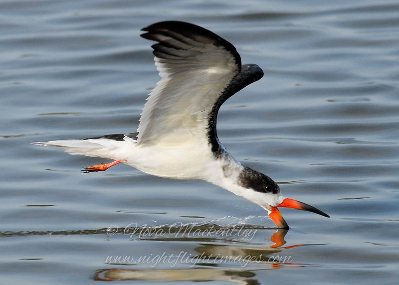 """Black Skimmer © 2010 Nova Mackentley South Padre Island, TX SKF  <div class=""""ss-paypal-button""""><div class=""""ss-paypal-add-to-cart-section""""><div class=""""ss-paypal-product-options""""><h4>Mat Sizes</h4><ul><li><a href=""""https://www.paypal.com/cgi-bin/webscr?cmd=_cart&business=T77V5VKCW4K2U&lc=US&item_name=Black%20Skimmer%20%C2%A9%202010%20Nova%20Mackentley%20South%20Padre%20Island%2C%20TX%20SKF&item_number=http%3A%2F%2Fwww.nightflightimages.com%2FGalleries-1%2FOur-Favorites%2Fi-WD9S27c&button_subtype=products&no_note=0&cn=Add%20special%20instructions%20to%20the%20seller%3A&no_shipping=2&currency_code=USD&weight_unit=lbs&add=1&bn=PP-ShopCartBF%3Abtn_cart_SM.gif%3ANonHosted&on0=Mat%20Sizes&option_select0=5%20x%207&option_amount0=10.00&option_select1=8%20x%2010&option_amount1=18.00&option_select2=11%20x%2014&option_amount2=28.00&option_select3=card&option_amount3=4.00&option_index=0&charset=utf-8&submit=&os0=5%20x%207"""" target=""""paypal""""><span>5 x 7 $11.00 USD</span><img src=""""https://www.paypalobjects.com/en_US/i/btn/btn_cart_SM.gif""""></a></li><li><a href=""""https://www.paypal.com/cgi-bin/webscr?cmd=_cart&business=T77V5VKCW4K2U&lc=US&item_name=Black%20Skimmer%20%C2%A9%202010%20Nova%20Mackentley%20South%20Padre%20Island%2C%20TX%20SKF&item_number=http%3A%2F%2Fwww.nightflightimages.com%2FGalleries-1%2FOur-Favorites%2Fi-WD9S27c&button_subtype=products&no_note=0&cn=Add%20special%20instructions%20to%20the%20seller%3A&no_shipping=2&currency_code=USD&weight_unit=lbs&add=1&bn=PP-ShopCartBF%3Abtn_cart_SM.gif%3ANonHosted&on0=Mat%20Sizes&option_select0=5%20x%207&option_amount0=10.00&option_select1=8%20x%2010&option_amount1=18.00&option_select2=11%20x%2014&option_amount2=28.00&option_select3=card&option_amount3=4.00&option_index=0&charset=utf-8&submit=&os0=8%20x%2010"""" target=""""paypal""""><span>8 x 10 $19.00 USD</span><img src=""""https://www.paypalobjects.com/en_US/i/btn/btn_cart_SM.gif""""></a></li><li><a href=""""https://www.paypal.com/cgi-bin/webscr?cmd=_cart&business=T77V5VKCW4K2U&lc=US&item_name=Black%2"""