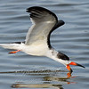 "Black Skimmer © 2010 Nova Mackentley South Padre Island, TX SKF  <div class=""ss-paypal-button""><div class=""ss-paypal-add-to-cart-section""><div class=""ss-paypal-product-options""><h4>Mat Sizes</h4><ul><li><a href=""https://www.paypal.com/cgi-bin/webscr?cmd=_cart&business=T77V5VKCW4K2U&lc=US&item_name=Black%20Skimmer%20%C2%A9%202010%20Nova%20Mackentley%20South%20Padre%20Island%2C%20TX%20SKF&item_number=http%3A%2F%2Fwww.nightflightimages.com%2FGalleries-1%2FOur-Favorites%2Fi-WD9S27c&button_subtype=products&no_note=0&cn=Add%20special%20instructions%20to%20the%20seller%3A&no_shipping=2&currency_code=USD&weight_unit=lbs&add=1&bn=PP-ShopCartBF%3Abtn_cart_SM.gif%3ANonHosted&on0=Mat%20Sizes&option_select0=5%20x%207&option_amount0=10.00&option_select1=8%20x%2010&option_amount1=18.00&option_select2=11%20x%2014&option_amount2=28.00&option_select3=card&option_amount3=4.00&option_index=0&charset=utf-8&submit=&os0=5%20x%207"" target=""paypal""><span>5 x 7 $11.00 USD</span><img src=""https://www.paypalobjects.com/en_US/i/btn/btn_cart_SM.gif""></a></li><li><a href=""https://www.paypal.com/cgi-bin/webscr?cmd=_cart&business=T77V5VKCW4K2U&lc=US&item_name=Black%20Skimmer%20%C2%A9%202010%20Nova%20Mackentley%20South%20Padre%20Island%2C%20TX%20SKF&item_number=http%3A%2F%2Fwww.nightflightimages.com%2FGalleries-1%2FOur-Favorites%2Fi-WD9S27c&button_subtype=products&no_note=0&cn=Add%20special%20instructions%20to%20the%20seller%3A&no_shipping=2&currency_code=USD&weight_unit=lbs&add=1&bn=PP-ShopCartBF%3Abtn_cart_SM.gif%3ANonHosted&on0=Mat%20Sizes&option_select0=5%20x%207&option_amount0=10.00&option_select1=8%20x%2010&option_amount1=18.00&option_select2=11%20x%2014&option_amount2=28.00&option_select3=card&option_amount3=4.00&option_index=0&charset=utf-8&submit=&os0=8%20x%2010"" target=""paypal""><span>8 x 10 $19.00 USD</span><img src=""https://www.paypalobjects.com/en_US/i/btn/btn_cart_SM.gif""></a></li><li><a href=""https://www.paypal.com/cgi-bin/webscr?cmd=_cart&business=T77V5VKCW4K2U&lc=US&item_name=Black%20Skimmer%20%C2%A9%202010%20Nova%20Mackentley%20South%20Padre%20Island%2C%20TX%20SKF&item_number=http%3A%2F%2Fwww.nightflightimages.com%2FGalleries-1%2FOur-Favorites%2Fi-WD9S27c&button_subtype=products&no_note=0&cn=Add%20special%20instructions%20to%20the%20seller%3A&no_shipping=2&currency_code=USD&weight_unit=lbs&add=1&bn=PP-ShopCartBF%3Abtn_cart_SM.gif%3ANonHosted&on0=Mat%20Sizes&option_select0=5%20x%207&option_amount0=10.00&option_select1=8%20x%2010&option_amount1=18.00&option_select2=11%20x%2014&option_amount2=28.00&option_select3=card&option_amount3=4.00&option_index=0&charset=utf-8&submit=&os0=11%20x%2014"" target=""paypal""><span>11 x 14 $29.00 USD</span><img src=""https://www.paypalobjects.com/en_US/i/btn/btn_cart_SM.gif""></a></li><li><a href=""https://www.paypal.com/cgi-bin/webscr?cmd=_cart&business=T77V5VKCW4K2U&lc=US&item_name=Black%20Skimmer%20%C2%A9%202010%20Nova%20Mackentley%20South%20Padre%20Island%2C%20TX%20SKF&item_number=http%3A%2F%2Fwww.nightflightimages.com%2FGalleries-1%2FOur-Favorites%2Fi-WD9S27c&button_subtype=products&no_note=0&cn=Add%20special%20instructions%20to%20the%20seller%3A&no_shipping=2&currency_code=USD&weight_unit=lbs&add=1&bn=PP-ShopCartBF%3Abtn_cart_SM.gif%3ANonHosted&on0=Mat%20Sizes&option_select0=5%20x%207&option_amount0=10.00&option_select1=8%20x%2010&option_amount1=18.00&option_select2=11%20x%2014&option_amount2=28.00&option_select3=card&option_amount3=4.00&option_index=0&charset=utf-8&submit=&os0=card"" target=""paypal""><span>card $5.00 USD</span><img src=""https://www.paypalobjects.com/en_US/i/btn/btn_cart_SM.gif""></a></li></ul></div></div> <div class=""ss-paypal-view-cart-section""><a href=""https://www.paypal.com/cgi-bin/webscr?cmd=_cart&business=T77V5VKCW4K2U&display=1&item_name=Black%20Skimmer%20%C2%A9%202010%20Nova%20Mackentley%20South%20Padre%20Island%2C%20TX%20SKF&item_number=http%3A%2F%2Fwww.nightflightimages.com%2FGalleries-1%2FOur-Favorites%2Fi-WD9S27c&charset=utf-8&submit="" target=""paypal"" class=""ss-paypal-submit-button""><img src=""https://www.paypalobjects.com/en_US/i/btn/btn_viewcart_LG.gif""></a></div></div><div class=""ss-paypal-button-end""></div>"