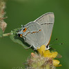 "Gray Hairstreak © 2009 Nova Mackentley Laguna Atascosa NWR, TX GHA  <div class=""ss-paypal-button""><div class=""ss-paypal-add-to-cart-section""><div class=""ss-paypal-product-options""><h4>Mat Sizes</h4><ul><li><a href=""https://www.paypal.com/cgi-bin/webscr?cmd=_cart&business=T77V5VKCW4K2U&lc=US&item_name=Gray%20Hairstreak%20%C2%A9%202009%20Nova%20Mackentley%20Laguna%20Atascosa%20NWR%2C%20TX%20GHA&item_number=http%3A%2F%2Fwww.nightflightimages.com%2FGalleries-1%2FButterflies%2Fi-WQjSx85&button_subtype=products&no_note=0&cn=Add%20special%20instructions%20to%20the%20seller%3A&no_shipping=2&currency_code=USD&weight_unit=lbs&add=1&bn=PP-ShopCartBF%3Abtn_cart_SM.gif%3ANonHosted&on0=Mat%20Sizes&option_select0=5%20x%207&option_amount0=10.00&option_select1=8%20x%2010&option_amount1=18.00&option_select2=11%20x%2014&option_amount2=28.00&option_select3=card&option_amount3=4.00&option_index=0&charset=utf-8&submit=&os0=5%20x%207"" target=""paypal""><span>5 x 7 $11.00 USD</span><img src=""https://www.paypalobjects.com/en_US/i/btn/btn_cart_SM.gif""></a></li><li><a href=""https://www.paypal.com/cgi-bin/webscr?cmd=_cart&business=T77V5VKCW4K2U&lc=US&item_name=Gray%20Hairstreak%20%C2%A9%202009%20Nova%20Mackentley%20Laguna%20Atascosa%20NWR%2C%20TX%20GHA&item_number=http%3A%2F%2Fwww.nightflightimages.com%2FGalleries-1%2FButterflies%2Fi-WQjSx85&button_subtype=products&no_note=0&cn=Add%20special%20instructions%20to%20the%20seller%3A&no_shipping=2&currency_code=USD&weight_unit=lbs&add=1&bn=PP-ShopCartBF%3Abtn_cart_SM.gif%3ANonHosted&on0=Mat%20Sizes&option_select0=5%20x%207&option_amount0=10.00&option_select1=8%20x%2010&option_amount1=18.00&option_select2=11%20x%2014&option_amount2=28.00&option_select3=card&option_amount3=4.00&option_index=0&charset=utf-8&submit=&os0=8%20x%2010"" target=""paypal""><span>8 x 10 $19.00 USD</span><img src=""https://www.paypalobjects.com/en_US/i/btn/btn_cart_SM.gif""></a></li><li><a href=""https://www.paypal.com/cgi-bin/webscr?cmd=_cart&business=T77V5VKCW4K2U&lc=US&item_name=Gray%20Hairstreak%20%C2%A9%202009%20Nova%20Mackentley%20Laguna%20Atascosa%20NWR%2C%20TX%20GHA&item_number=http%3A%2F%2Fwww.nightflightimages.com%2FGalleries-1%2FButterflies%2Fi-WQjSx85&button_subtype=products&no_note=0&cn=Add%20special%20instructions%20to%20the%20seller%3A&no_shipping=2&currency_code=USD&weight_unit=lbs&add=1&bn=PP-ShopCartBF%3Abtn_cart_SM.gif%3ANonHosted&on0=Mat%20Sizes&option_select0=5%20x%207&option_amount0=10.00&option_select1=8%20x%2010&option_amount1=18.00&option_select2=11%20x%2014&option_amount2=28.00&option_select3=card&option_amount3=4.00&option_index=0&charset=utf-8&submit=&os0=11%20x%2014"" target=""paypal""><span>11 x 14 $29.00 USD</span><img src=""https://www.paypalobjects.com/en_US/i/btn/btn_cart_SM.gif""></a></li><li><a href=""https://www.paypal.com/cgi-bin/webscr?cmd=_cart&business=T77V5VKCW4K2U&lc=US&item_name=Gray%20Hairstreak%20%C2%A9%202009%20Nova%20Mackentley%20Laguna%20Atascosa%20NWR%2C%20TX%20GHA&item_number=http%3A%2F%2Fwww.nightflightimages.com%2FGalleries-1%2FButterflies%2Fi-WQjSx85&button_subtype=products&no_note=0&cn=Add%20special%20instructions%20to%20the%20seller%3A&no_shipping=2&currency_code=USD&weight_unit=lbs&add=1&bn=PP-ShopCartBF%3Abtn_cart_SM.gif%3ANonHosted&on0=Mat%20Sizes&option_select0=5%20x%207&option_amount0=10.00&option_select1=8%20x%2010&option_amount1=18.00&option_select2=11%20x%2014&option_amount2=28.00&option_select3=card&option_amount3=4.00&option_index=0&charset=utf-8&submit=&os0=card"" target=""paypal""><span>card $5.00 USD</span><img src=""https://www.paypalobjects.com/en_US/i/btn/btn_cart_SM.gif""></a></li></ul></div></div> <div class=""ss-paypal-view-cart-section""><a href=""https://www.paypal.com/cgi-bin/webscr?cmd=_cart&business=T77V5VKCW4K2U&display=1&item_name=Gray%20Hairstreak%20%C2%A9%202009%20Nova%20Mackentley%20Laguna%20Atascosa%20NWR%2C%20TX%20GHA&item_number=http%3A%2F%2Fwww.nightflightimages.com%2FGalleries-1%2FButterflies%2Fi-WQjSx85&charset=utf-8&submit="" target=""paypal"" class=""ss-paypal-submit-button""><img src=""https://www.paypalobjects.com/en_US/i/btn/btn_viewcart_LG.gif""></a></div></div><div class=""ss-paypal-button-end""></div>"