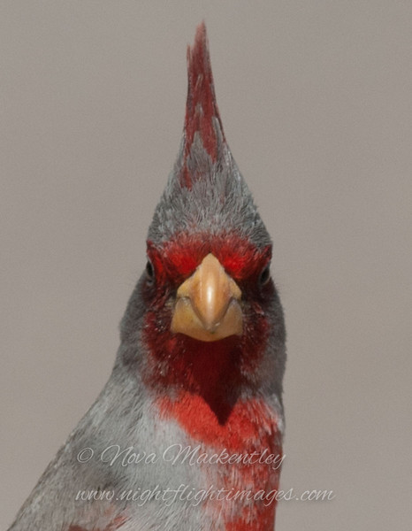 "Pyrrhuloxia © 2010 Nova Mackentley Falcon Dam SP, TX PYF  <div class=""ss-paypal-button""><div class=""ss-paypal-add-to-cart-section""><div class=""ss-paypal-product-options""><h4>Mat Sizes</h4><ul><li><a href=""https://www.paypal.com/cgi-bin/webscr?cmd=_cart&business=T77V5VKCW4K2U&lc=US&item_name=Pyrrhuloxia%20%C2%A9%202010%20Nova%20Mackentley%20Falcon%20Dam%20SP%2C%20TX%20PYF&item_number=http%3A%2F%2Fwww.nightflightimages.com%2FGalleries-1%2FImpressions%2Fi-XxTNVsw&button_subtype=products&no_note=0&cn=Add%20special%20instructions%20to%20the%20seller%3A&no_shipping=2&currency_code=USD&weight_unit=lbs&add=1&bn=PP-ShopCartBF%3Abtn_cart_SM.gif%3ANonHosted&on0=Mat%20Sizes&option_select0=5%20x%207&option_amount0=10.00&option_select1=8%20x%2010&option_amount1=18.00&option_select2=11%20x%2014&option_amount2=28.00&option_select3=card&option_amount3=4.00&option_index=0&charset=utf-8&submit=&os0=5%20x%207"" target=""paypal""><span>5 x 7 $11.00 USD</span><img src=""https://www.paypalobjects.com/en_US/i/btn/btn_cart_SM.gif""></a></li><li><a href=""https://www.paypal.com/cgi-bin/webscr?cmd=_cart&business=T77V5VKCW4K2U&lc=US&item_name=Pyrrhuloxia%20%C2%A9%202010%20Nova%20Mackentley%20Falcon%20Dam%20SP%2C%20TX%20PYF&item_number=http%3A%2F%2Fwww.nightflightimages.com%2FGalleries-1%2FImpressions%2Fi-XxTNVsw&button_subtype=products&no_note=0&cn=Add%20special%20instructions%20to%20the%20seller%3A&no_shipping=2&currency_code=USD&weight_unit=lbs&add=1&bn=PP-ShopCartBF%3Abtn_cart_SM.gif%3ANonHosted&on0=Mat%20Sizes&option_select0=5%20x%207&option_amount0=10.00&option_select1=8%20x%2010&option_amount1=18.00&option_select2=11%20x%2014&option_amount2=28.00&option_select3=card&option_amount3=4.00&option_index=0&charset=utf-8&submit=&os0=8%20x%2010"" target=""paypal""><span>8 x 10 $19.00 USD</span><img src=""https://www.paypalobjects.com/en_US/i/btn/btn_cart_SM.gif""></a></li><li><a href=""https://www.paypal.com/cgi-bin/webscr?cmd=_cart&business=T77V5VKCW4K2U&lc=US&item_name=Pyrrhuloxia%20%C2%A9%202010%20Nova%20Mackentley%20Falcon%20Dam%20SP%2C%20TX%20PYF&item_number=http%3A%2F%2Fwww.nightflightimages.com%2FGalleries-1%2FImpressions%2Fi-XxTNVsw&button_subtype=products&no_note=0&cn=Add%20special%20instructions%20to%20the%20seller%3A&no_shipping=2&currency_code=USD&weight_unit=lbs&add=1&bn=PP-ShopCartBF%3Abtn_cart_SM.gif%3ANonHosted&on0=Mat%20Sizes&option_select0=5%20x%207&option_amount0=10.00&option_select1=8%20x%2010&option_amount1=18.00&option_select2=11%20x%2014&option_amount2=28.00&option_select3=card&option_amount3=4.00&option_index=0&charset=utf-8&submit=&os0=11%20x%2014"" target=""paypal""><span>11 x 14 $29.00 USD</span><img src=""https://www.paypalobjects.com/en_US/i/btn/btn_cart_SM.gif""></a></li><li><a href=""https://www.paypal.com/cgi-bin/webscr?cmd=_cart&business=T77V5VKCW4K2U&lc=US&item_name=Pyrrhuloxia%20%C2%A9%202010%20Nova%20Mackentley%20Falcon%20Dam%20SP%2C%20TX%20PYF&item_number=http%3A%2F%2Fwww.nightflightimages.com%2FGalleries-1%2FImpressions%2Fi-XxTNVsw&button_subtype=products&no_note=0&cn=Add%20special%20instructions%20to%20the%20seller%3A&no_shipping=2&currency_code=USD&weight_unit=lbs&add=1&bn=PP-ShopCartBF%3Abtn_cart_SM.gif%3ANonHosted&on0=Mat%20Sizes&option_select0=5%20x%207&option_amount0=10.00&option_select1=8%20x%2010&option_amount1=18.00&option_select2=11%20x%2014&option_amount2=28.00&option_select3=card&option_amount3=4.00&option_index=0&charset=utf-8&submit=&os0=card"" target=""paypal""><span>card $5.00 USD</span><img src=""https://www.paypalobjects.com/en_US/i/btn/btn_cart_SM.gif""></a></li></ul></div></div> <div class=""ss-paypal-view-cart-section""><a href=""https://www.paypal.com/cgi-bin/webscr?cmd=_cart&business=T77V5VKCW4K2U&display=1&item_name=Pyrrhuloxia%20%C2%A9%202010%20Nova%20Mackentley%20Falcon%20Dam%20SP%2C%20TX%20PYF&item_number=http%3A%2F%2Fwww.nightflightimages.com%2FGalleries-1%2FImpressions%2Fi-XxTNVsw&charset=utf-8&submit="" target=""paypal"" class=""ss-paypal-submit-button""><img src=""https://www.paypalobjects.com/en_US/i/btn/btn_viewcart_LG.gif""></a></div></div><div class=""ss-paypal-button-end""></div>"