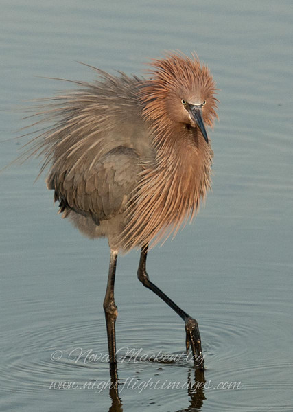 """Reddish Egret fluff © 2010 Nova Mackentley South Padre Island, TX REB  <div class=""""ss-paypal-button""""> <div class=""""ss-paypal-add-to-cart-section""""><div class=""""ss-paypal-product-options""""> <h4>Mat Sizes</h4> <ul> <li><a href=""""https://www.paypal.com/cgi-bin/webscr?cmd=_cart&amp;business=T77V5VKCW4K2U&amp;lc=US&amp;item_name=Reddish%20Egret%20fluff%20%C2%A9%202010%20Nova%20Mackentley%20South%20Padre%20Island%2C%20TX%20REB&amp;item_number=http%3A%2F%2Fwww.nightflightimages.com%2FGalleries-1%2FLower-Rio-Grande-Valley-TX%2Fi-ZH2fjLW&amp;button_subtype=products&amp;no_note=0&amp;cn=Add%20special%20instructions%20to%20the%20seller%3A&amp;no_shipping=2&amp;currency_code=USD&amp;weight_unit=lbs&amp;add=1&amp;bn=PP-ShopCartBF%3Abtn_cart_SM.gif%3ANonHosted&amp;on0=Mat%20Sizes&amp;option_select0=5%20x%207&amp;option_amount0=10.00&amp;option_select1=8%20x%2010&amp;option_amount1=18.00&amp;option_select2=11%20x%2014&amp;option_amount2=28.00&amp;option_select3=card&amp;option_amount3=4.00&amp;option_index=0&amp;submit=&amp;os0=5%20x%207"""" target=""""paypal""""><span>5 x 7 $10.00 USD</span><img src=""""https://www.paypalobjects.com/en_US/i/btn/btn_cart_SM.gif""""></a></li> <li><a href=""""https://www.paypal.com/cgi-bin/webscr?cmd=_cart&amp;business=T77V5VKCW4K2U&amp;lc=US&amp;item_name=Reddish%20Egret%20fluff%20%C2%A9%202010%20Nova%20Mackentley%20South%20Padre%20Island%2C%20TX%20REB&amp;item_number=http%3A%2F%2Fwww.nightflightimages.com%2FGalleries-1%2FLower-Rio-Grande-Valley-TX%2Fi-ZH2fjLW&amp;button_subtype=products&amp;no_note=0&amp;cn=Add%20special%20instructions%20to%20the%20seller%3A&amp;no_shipping=2&amp;currency_code=USD&amp;weight_unit=lbs&amp;add=1&amp;bn=PP-ShopCartBF%3Abtn_cart_SM.gif%3ANonHosted&amp;on0=Mat%20Sizes&amp;option_select0=5%20x%207&amp;option_amount0=10.00&amp;option_select1=8%20x%2010&amp;option_amount1=18.00&amp;option_select2=11%20x%2014&amp;option_amount2=28.00&amp;option_select3=card&amp;option_amount3=4.00&amp;option_index=0&amp;submit=&amp;os0=8%20x%2010"""" target=""""paypal"""