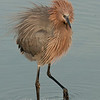 "Reddish Egret fluff © 2010 Nova Mackentley South Padre Island, TX REB  <div class=""ss-paypal-button""> <div class=""ss-paypal-add-to-cart-section""><div class=""ss-paypal-product-options""> <h4>Mat Sizes</h4> <ul> <li><a href=""https://www.paypal.com/cgi-bin/webscr?cmd=_cart&amp;business=T77V5VKCW4K2U&amp;lc=US&amp;item_name=Reddish%20Egret%20fluff%20%C2%A9%202010%20Nova%20Mackentley%20South%20Padre%20Island%2C%20TX%20REB&amp;item_number=http%3A%2F%2Fwww.nightflightimages.com%2FGalleries-1%2FLower-Rio-Grande-Valley-TX%2Fi-ZH2fjLW&amp;button_subtype=products&amp;no_note=0&amp;cn=Add%20special%20instructions%20to%20the%20seller%3A&amp;no_shipping=2&amp;currency_code=USD&amp;weight_unit=lbs&amp;add=1&amp;bn=PP-ShopCartBF%3Abtn_cart_SM.gif%3ANonHosted&amp;on0=Mat%20Sizes&amp;option_select0=5%20x%207&amp;option_amount0=10.00&amp;option_select1=8%20x%2010&amp;option_amount1=18.00&amp;option_select2=11%20x%2014&amp;option_amount2=28.00&amp;option_select3=card&amp;option_amount3=4.00&amp;option_index=0&amp;submit=&amp;os0=5%20x%207"" target=""paypal""><span>5 x 7 $10.00 USD</span><img src=""https://www.paypalobjects.com/en_US/i/btn/btn_cart_SM.gif""></a></li> <li><a href=""https://www.paypal.com/cgi-bin/webscr?cmd=_cart&amp;business=T77V5VKCW4K2U&amp;lc=US&amp;item_name=Reddish%20Egret%20fluff%20%C2%A9%202010%20Nova%20Mackentley%20South%20Padre%20Island%2C%20TX%20REB&amp;item_number=http%3A%2F%2Fwww.nightflightimages.com%2FGalleries-1%2FLower-Rio-Grande-Valley-TX%2Fi-ZH2fjLW&amp;button_subtype=products&amp;no_note=0&amp;cn=Add%20special%20instructions%20to%20the%20seller%3A&amp;no_shipping=2&amp;currency_code=USD&amp;weight_unit=lbs&amp;add=1&amp;bn=PP-ShopCartBF%3Abtn_cart_SM.gif%3ANonHosted&amp;on0=Mat%20Sizes&amp;option_select0=5%20x%207&amp;option_amount0=10.00&amp;option_select1=8%20x%2010&amp;option_amount1=18.00&amp;option_select2=11%20x%2014&amp;option_amount2=28.00&amp;option_select3=card&amp;option_amount3=4.00&amp;option_index=0&amp;submit=&amp;os0=8%20x%2010"" target=""paypal""><span>8 x 10 $18.00 USD</span><img src=""https://www.paypalobjects.com/en_US/i/btn/btn_cart_SM.gif""></a></li> <li><a href=""https://www.paypal.com/cgi-bin/webscr?cmd=_cart&amp;business=T77V5VKCW4K2U&amp;lc=US&amp;item_name=Reddish%20Egret%20fluff%20%C2%A9%202010%20Nova%20Mackentley%20South%20Padre%20Island%2C%20TX%20REB&amp;item_number=http%3A%2F%2Fwww.nightflightimages.com%2FGalleries-1%2FLower-Rio-Grande-Valley-TX%2Fi-ZH2fjLW&amp;button_subtype=products&amp;no_note=0&amp;cn=Add%20special%20instructions%20to%20the%20seller%3A&amp;no_shipping=2&amp;currency_code=USD&amp;weight_unit=lbs&amp;add=1&amp;bn=PP-ShopCartBF%3Abtn_cart_SM.gif%3ANonHosted&amp;on0=Mat%20Sizes&amp;option_select0=5%20x%207&amp;option_amount0=10.00&amp;option_select1=8%20x%2010&amp;option_amount1=18.00&amp;option_select2=11%20x%2014&amp;option_amount2=28.00&amp;option_select3=card&amp;option_amount3=4.00&amp;option_index=0&amp;submit=&amp;os0=11%20x%2014"" target=""paypal""><span>11 x 14 $28.00 USD</span><img src=""https://www.paypalobjects.com/en_US/i/btn/btn_cart_SM.gif""></a></li> <li><a href=""https://www.paypal.com/cgi-bin/webscr?cmd=_cart&amp;business=T77V5VKCW4K2U&amp;lc=US&amp;item_name=Reddish%20Egret%20fluff%20%C2%A9%202010%20Nova%20Mackentley%20South%20Padre%20Island%2C%20TX%20REB&amp;item_number=http%3A%2F%2Fwww.nightflightimages.com%2FGalleries-1%2FLower-Rio-Grande-Valley-TX%2Fi-ZH2fjLW&amp;button_subtype=products&amp;no_note=0&amp;cn=Add%20special%20instructions%20to%20the%20seller%3A&amp;no_shipping=2&amp;currency_code=USD&amp;weight_unit=lbs&amp;add=1&amp;bn=PP-ShopCartBF%3Abtn_cart_SM.gif%3ANonHosted&amp;on0=Mat%20Sizes&amp;option_select0=5%20x%207&amp;option_amount0=10.00&amp;option_select1=8%20x%2010&amp;option_amount1=18.00&amp;option_select2=11%20x%2014&amp;option_amount2=28.00&amp;option_select3=card&amp;option_amount3=4.00&amp;option_index=0&amp;submit=&amp;os0=card"" target=""paypal""><span>card $4.00 USD</span><img src=""https://www.paypalobjects.com/en_US/i/btn/btn_cart_SM.gif""></a></li> </ul> </div></div> <div class=""ss-paypal-view-cart-section""><a href=""https://www.paypal.com/cgi-bin/webscr?cmd=_cart&amp;business=T77V5VKCW4K2U&amp;display=1&amp;item_name=Reddish%20Egret%20fluff%20%C2%A9%202010%20Nova%20Mackentley%20South%20Padre%20Island%2C%20TX%20REB&amp;item_number=http%3A%2F%2Fwww.nightflightimages.com%2FGalleries-1%2FLower-Rio-Grande-Valley-TX%2Fi-ZH2fjLW&amp;submit="" target=""paypal"" class=""ss-paypal-submit-button""><img src=""https://www.paypalobjects.com/en_US/i/btn/btn_viewcart_LG.gif""></a></div> </div><div class=""ss-paypal-button-end"" style=""""></div>"