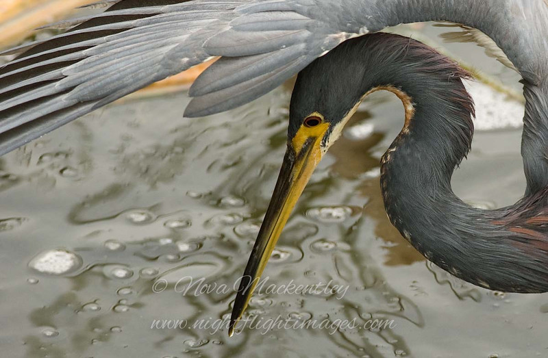 "Tri-colored Heron © 2007 Nova Mackentley South Padre Island, TX TCH  <div class=""ss-paypal-button""> <div class=""ss-paypal-add-to-cart-section""><div class=""ss-paypal-product-options""> <h4>Mat Sizes</h4> <ul> <li><a href=""https://www.paypal.com/cgi-bin/webscr?cmd=_cart&business=T77V5VKCW4K2U&lc=US&item_name=Tri-colored%20Heron%20%C2%A9%202007%20Nova%20Mackentley%20South%20Padre%20Island%2C%20TX%20TCH&item_number=http%3A%2F%2Fwww.nightflightimages.com%2FGalleries-1%2FLower-Rio-Grande-Valley-TX%2Fi-c9QQh3d&button_subtype=products&no_note=0&cn=Add%20special%20instructions%20to%20the%20seller%3A&no_shipping=2&currency_code=USD&weight_unit=lbs&add=1&bn=PP-ShopCartBF%3Abtn_cart_SM.gif%3ANonHosted&on0=Mat%20Sizes&option_select0=5%20x%207&option_amount0=10.00&option_select1=8%20x%2010&option_amount1=18.00&option_select2=11%20x%2014&option_amount2=28.00&option_select3=card&option_amount3=4.00&option_index=0&submit=&os0=5%20x%207"" target=""paypal""><span>5 x 7 $10.00 USD</span><img src=""https://www.paypalobjects.com/en_US/i/btn/btn_cart_SM.gif""></a></li> <li><a href=""https://www.paypal.com/cgi-bin/webscr?cmd=_cart&business=T77V5VKCW4K2U&lc=US&item_name=Tri-colored%20Heron%20%C2%A9%202007%20Nova%20Mackentley%20South%20Padre%20Island%2C%20TX%20TCH&item_number=http%3A%2F%2Fwww.nightflightimages.com%2FGalleries-1%2FLower-Rio-Grande-Valley-TX%2Fi-c9QQh3d&button_subtype=products&no_note=0&cn=Add%20special%20instructions%20to%20the%20seller%3A&no_shipping=2&currency_code=USD&weight_unit=lbs&add=1&bn=PP-ShopCartBF%3Abtn_cart_SM.gif%3ANonHosted&on0=Mat%20Sizes&option_select0=5%20x%207&option_amount0=10.00&option_select1=8%20x%2010&option_amount1=18.00&option_select2=11%20x%2014&option_amount2=28.00&option_select3=card&option_amount3=4.00&option_index=0&submit=&os0=8%20x%2010"" target=""paypal""><span>8 x 10 $18.00 USD</span><img src=""https://www.paypalobjects.com/en_US/i/btn/btn_cart_SM.gif""></a></li> <li><a href=""https://www.paypal.com/cgi-bin/webscr?cmd=_cart&business=T77V5VKCW4K2U&lc=US&item_name=Tri-colored%20Heron%20%C2%A9%202007%20Nova%20Mackentley%20South%20Padre%20Island%2C%20TX%20TCH&item_number=http%3A%2F%2Fwww.nightflightimages.com%2FGalleries-1%2FLower-Rio-Grande-Valley-TX%2Fi-c9QQh3d&button_subtype=products&no_note=0&cn=Add%20special%20instructions%20to%20the%20seller%3A&no_shipping=2&currency_code=USD&weight_unit=lbs&add=1&bn=PP-ShopCartBF%3Abtn_cart_SM.gif%3ANonHosted&on0=Mat%20Sizes&option_select0=5%20x%207&option_amount0=10.00&option_select1=8%20x%2010&option_amount1=18.00&option_select2=11%20x%2014&option_amount2=28.00&option_select3=card&option_amount3=4.00&option_index=0&submit=&os0=11%20x%2014"" target=""paypal""><span>11 x 14 $28.00 USD</span><img src=""https://www.paypalobjects.com/en_US/i/btn/btn_cart_SM.gif""></a></li> <li><a href=""https://www.paypal.com/cgi-bin/webscr?cmd=_cart&business=T77V5VKCW4K2U&lc=US&item_name=Tri-colored%20Heron%20%C2%A9%202007%20Nova%20Mackentley%20South%20Padre%20Island%2C%20TX%20TCH&item_number=http%3A%2F%2Fwww.nightflightimages.com%2FGalleries-1%2FLower-Rio-Grande-Valley-TX%2Fi-c9QQh3d&button_subtype=products&no_note=0&cn=Add%20special%20instructions%20to%20the%20seller%3A&no_shipping=2&currency_code=USD&weight_unit=lbs&add=1&bn=PP-ShopCartBF%3Abtn_cart_SM.gif%3ANonHosted&on0=Mat%20Sizes&option_select0=5%20x%207&option_amount0=10.00&option_select1=8%20x%2010&option_amount1=18.00&option_select2=11%20x%2014&option_amount2=28.00&option_select3=card&option_amount3=4.00&option_index=0&submit=&os0=card"" target=""paypal""><span>card $4.00 USD</span><img src=""https://www.paypalobjects.com/en_US/i/btn/btn_cart_SM.gif""></a></li> </ul> </div></div> <div class=""ss-paypal-view-cart-section""><a href=""https://www.paypal.com/cgi-bin/webscr?cmd=_cart&business=T77V5VKCW4K2U&display=1&item_name=Tri-colored%20Heron%20%C2%A9%202007%20Nova%20Mackentley%20South%20Padre%20Island%2C%20TX%20TCH&item_number=http%3A%2F%2Fwww.nightflightimages.com%2FGalleries-1%2FLower-Rio-Grande-Valley-TX%2Fi-c9QQh3d&submit="" target=""paypal"" class=""ss-paypal-submit-button""><img src=""https://www.paypalobjects.com/en_US/i/btn/btn_viewcart_LG.gif""></a></div> </div><div class=""ss-paypal-button-end"" style=""""></div>"
