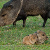 "Javelina family © 2010 Nova Mackentley Bentsen-Rio Grande SP, TX JAF  <div class=""ss-paypal-button""><div class=""ss-paypal-add-to-cart-section""><div class=""ss-paypal-product-options""><h4>Mat Sizes</h4><ul><li><a href=""https://www.paypal.com/cgi-bin/webscr?cmd=_cart&business=T77V5VKCW4K2U&lc=US&item_name=Javelina%20family%20%C2%A9%202010%20Nova%20Mackentley%20Bentsen-Rio%20Grande%20SP%2C%20TX%20JAF&item_number=http%3A%2F%2Fwww.nightflightimages.com%2FGalleries-1%2FMammals%2Fi-cwcbP63&button_subtype=products&no_note=0&cn=Add%20special%20instructions%20to%20the%20seller%3A&no_shipping=2&currency_code=USD&weight_unit=lbs&add=1&bn=PP-ShopCartBF%3Abtn_cart_SM.gif%3ANonHosted&on0=Mat%20Sizes&option_select0=5%20x%207&option_amount0=10.00&option_select1=8%20x%2010&option_amount1=18.00&option_select2=11%20x%2014&option_amount2=28.00&option_select3=card&option_amount3=4.00&option_index=0&charset=utf-8&submit=&os0=5%20x%207"" target=""paypal""><span>5 x 7 $11.00 USD</span><img src=""https://www.paypalobjects.com/en_US/i/btn/btn_cart_SM.gif""></a></li><li><a href=""https://www.paypal.com/cgi-bin/webscr?cmd=_cart&business=T77V5VKCW4K2U&lc=US&item_name=Javelina%20family%20%C2%A9%202010%20Nova%20Mackentley%20Bentsen-Rio%20Grande%20SP%2C%20TX%20JAF&item_number=http%3A%2F%2Fwww.nightflightimages.com%2FGalleries-1%2FMammals%2Fi-cwcbP63&button_subtype=products&no_note=0&cn=Add%20special%20instructions%20to%20the%20seller%3A&no_shipping=2&currency_code=USD&weight_unit=lbs&add=1&bn=PP-ShopCartBF%3Abtn_cart_SM.gif%3ANonHosted&on0=Mat%20Sizes&option_select0=5%20x%207&option_amount0=10.00&option_select1=8%20x%2010&option_amount1=18.00&option_select2=11%20x%2014&option_amount2=28.00&option_select3=card&option_amount3=4.00&option_index=0&charset=utf-8&submit=&os0=8%20x%2010"" target=""paypal""><span>8 x 10 $19.00 USD</span><img src=""https://www.paypalobjects.com/en_US/i/btn/btn_cart_SM.gif""></a></li><li><a href=""https://www.paypal.com/cgi-bin/webscr?cmd=_cart&business=T77V5VKCW4K2U&lc=US&item_name=Javelina%20family%20%C2%A9%202010%20Nova%20Mackentley%20Bentsen-Rio%20Grande%20SP%2C%20TX%20JAF&item_number=http%3A%2F%2Fwww.nightflightimages.com%2FGalleries-1%2FMammals%2Fi-cwcbP63&button_subtype=products&no_note=0&cn=Add%20special%20instructions%20to%20the%20seller%3A&no_shipping=2&currency_code=USD&weight_unit=lbs&add=1&bn=PP-ShopCartBF%3Abtn_cart_SM.gif%3ANonHosted&on0=Mat%20Sizes&option_select0=5%20x%207&option_amount0=10.00&option_select1=8%20x%2010&option_amount1=18.00&option_select2=11%20x%2014&option_amount2=28.00&option_select3=card&option_amount3=4.00&option_index=0&charset=utf-8&submit=&os0=11%20x%2014"" target=""paypal""><span>11 x 14 $29.00 USD</span><img src=""https://www.paypalobjects.com/en_US/i/btn/btn_cart_SM.gif""></a></li><li><a href=""https://www.paypal.com/cgi-bin/webscr?cmd=_cart&business=T77V5VKCW4K2U&lc=US&item_name=Javelina%20family%20%C2%A9%202010%20Nova%20Mackentley%20Bentsen-Rio%20Grande%20SP%2C%20TX%20JAF&item_number=http%3A%2F%2Fwww.nightflightimages.com%2FGalleries-1%2FMammals%2Fi-cwcbP63&button_subtype=products&no_note=0&cn=Add%20special%20instructions%20to%20the%20seller%3A&no_shipping=2&currency_code=USD&weight_unit=lbs&add=1&bn=PP-ShopCartBF%3Abtn_cart_SM.gif%3ANonHosted&on0=Mat%20Sizes&option_select0=5%20x%207&option_amount0=10.00&option_select1=8%20x%2010&option_amount1=18.00&option_select2=11%20x%2014&option_amount2=28.00&option_select3=card&option_amount3=4.00&option_index=0&charset=utf-8&submit=&os0=card"" target=""paypal""><span>card $5.00 USD</span><img src=""https://www.paypalobjects.com/en_US/i/btn/btn_cart_SM.gif""></a></li></ul></div></div> <div class=""ss-paypal-view-cart-section""><a href=""https://www.paypal.com/cgi-bin/webscr?cmd=_cart&business=T77V5VKCW4K2U&display=1&item_name=Javelina%20family%20%C2%A9%202010%20Nova%20Mackentley%20Bentsen-Rio%20Grande%20SP%2C%20TX%20JAF&item_number=http%3A%2F%2Fwww.nightflightimages.com%2FGalleries-1%2FMammals%2Fi-cwcbP63&charset=utf-8&submit="" target=""paypal"" class=""ss-paypal-submit-button""><img src=""https://www.paypalobjects.com/en_US/i/btn/btn_viewcart_LG.gif""></a></div></div><div class=""ss-paypal-button-end""></div>"
