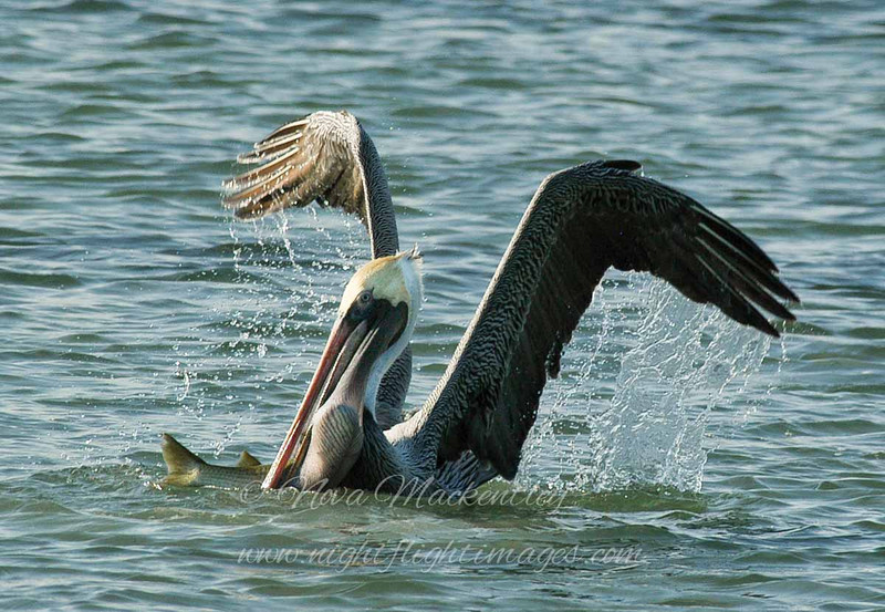 "Brown Pelican with large fish © 2008 Nova Mackentley Laguna Atascosa NWR, TX PLF  <div class=""ss-paypal-button""><div class=""ss-paypal-add-to-cart-section""><div class=""ss-paypal-product-options""><h4>Mat Sizes</h4><ul><li><a href=""https://www.paypal.com/cgi-bin/webscr?cmd=_cart&business=T77V5VKCW4K2U&lc=US&item_name=Brown%20Pelican%20with%20large%20fish%20%C2%A9%202008%20Nova%20Mackentley%20Laguna%20Atascosa%20NWR%2C%20TX%20PLF&item_number=http%3A%2F%2Fwww.nightflightimages.com%2FGalleries-1%2FOur-Favorites%2Fi-d4WhBHg&button_subtype=products&no_note=0&cn=Add%20special%20instructions%20to%20the%20seller%3A&no_shipping=2&currency_code=USD&weight_unit=lbs&add=1&bn=PP-ShopCartBF%3Abtn_cart_SM.gif%3ANonHosted&on0=Mat%20Sizes&option_select0=5%20x%207&option_amount0=10.00&option_select1=8%20x%2010&option_amount1=18.00&option_select2=11%20x%2014&option_amount2=28.00&option_select3=card&option_amount3=4.00&option_index=0&charset=utf-8&submit=&os0=5%20x%207"" target=""paypal""><span>5 x 7 $11.00 USD</span><img src=""https://www.paypalobjects.com/en_US/i/btn/btn_cart_SM.gif""></a></li><li><a href=""https://www.paypal.com/cgi-bin/webscr?cmd=_cart&business=T77V5VKCW4K2U&lc=US&item_name=Brown%20Pelican%20with%20large%20fish%20%C2%A9%202008%20Nova%20Mackentley%20Laguna%20Atascosa%20NWR%2C%20TX%20PLF&item_number=http%3A%2F%2Fwww.nightflightimages.com%2FGalleries-1%2FOur-Favorites%2Fi-d4WhBHg&button_subtype=products&no_note=0&cn=Add%20special%20instructions%20to%20the%20seller%3A&no_shipping=2&currency_code=USD&weight_unit=lbs&add=1&bn=PP-ShopCartBF%3Abtn_cart_SM.gif%3ANonHosted&on0=Mat%20Sizes&option_select0=5%20x%207&option_amount0=10.00&option_select1=8%20x%2010&option_amount1=18.00&option_select2=11%20x%2014&option_amount2=28.00&option_select3=card&option_amount3=4.00&option_index=0&charset=utf-8&submit=&os0=8%20x%2010"" target=""paypal""><span>8 x 10 $19.00 USD</span><img src=""https://www.paypalobjects.com/en_US/i/btn/btn_cart_SM.gif""></a></li><li><a href=""https://www.paypal.com/cgi-bin/webscr?cmd=_cart&business=T77V5VKCW4K2U&lc=US&item_name=Brown%20Pelican%20with%20large%20fish%20%C2%A9%202008%20Nova%20Mackentley%20Laguna%20Atascosa%20NWR%2C%20TX%20PLF&item_number=http%3A%2F%2Fwww.nightflightimages.com%2FGalleries-1%2FOur-Favorites%2Fi-d4WhBHg&button_subtype=products&no_note=0&cn=Add%20special%20instructions%20to%20the%20seller%3A&no_shipping=2&currency_code=USD&weight_unit=lbs&add=1&bn=PP-ShopCartBF%3Abtn_cart_SM.gif%3ANonHosted&on0=Mat%20Sizes&option_select0=5%20x%207&option_amount0=10.00&option_select1=8%20x%2010&option_amount1=18.00&option_select2=11%20x%2014&option_amount2=28.00&option_select3=card&option_amount3=4.00&option_index=0&charset=utf-8&submit=&os0=11%20x%2014"" target=""paypal""><span>11 x 14 $29.00 USD</span><img src=""https://www.paypalobjects.com/en_US/i/btn/btn_cart_SM.gif""></a></li><li><a href=""https://www.paypal.com/cgi-bin/webscr?cmd=_cart&business=T77V5VKCW4K2U&lc=US&item_name=Brown%20Pelican%20with%20large%20fish%20%C2%A9%202008%20Nova%20Mackentley%20Laguna%20Atascosa%20NWR%2C%20TX%20PLF&item_number=http%3A%2F%2Fwww.nightflightimages.com%2FGalleries-1%2FOur-Favorites%2Fi-d4WhBHg&button_subtype=products&no_note=0&cn=Add%20special%20instructions%20to%20the%20seller%3A&no_shipping=2&currency_code=USD&weight_unit=lbs&add=1&bn=PP-ShopCartBF%3Abtn_cart_SM.gif%3ANonHosted&on0=Mat%20Sizes&option_select0=5%20x%207&option_amount0=10.00&option_select1=8%20x%2010&option_amount1=18.00&option_select2=11%20x%2014&option_amount2=28.00&option_select3=card&option_amount3=4.00&option_index=0&charset=utf-8&submit=&os0=card"" target=""paypal""><span>card $5.00 USD</span><img src=""https://www.paypalobjects.com/en_US/i/btn/btn_cart_SM.gif""></a></li></ul></div></div> <div class=""ss-paypal-view-cart-section""><a href=""https://www.paypal.com/cgi-bin/webscr?cmd=_cart&business=T77V5VKCW4K2U&display=1&item_name=Brown%20Pelican%20with%20large%20fish%20%C2%A9%202008%20Nova%20Mackentley%20Laguna%20Atascosa%20NWR%2C%20TX%20PLF&item_number=http%3A%2F%2Fwww.nightflightimages.com%2FGalleries-1%2FOur-Favorites%2Fi-d4WhBHg&charset=utf-8&submit="" target=""paypal"" class=""ss-paypal-submit-button""><img src=""https://www.paypalobjects.com/en_US/i/btn/btn_viewcart_LG.gif""></a></div></div><div class=""ss-paypal-button-end""></div>"