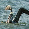 "Brown Pelican with large fish © 2008 Nova Mackentley Laguna Atascosa NWR, TX PLF  <div class=""ss-paypal-button""><div class=""ss-paypal-add-to-cart-section""><div class=""ss-paypal-product-options""><h4>Mat Sizes</h4><ul><li><a href=""https://www.paypal.com/cgi-bin/webscr?cmd=_cart&amp;business=T77V5VKCW4K2U&amp;lc=US&amp;item_name=Brown%20Pelican%20with%20large%20fish%20%C2%A9%202008%20Nova%20Mackentley%20Laguna%20Atascosa%20NWR%2C%20TX%20PLF&amp;item_number=http%3A%2F%2Fwww.nightflightimages.com%2FGalleries-1%2FOur-Favorites%2Fi-d4WhBHg&amp;button_subtype=products&amp;no_note=0&amp;cn=Add%20special%20instructions%20to%20the%20seller%3A&amp;no_shipping=2&amp;currency_code=USD&amp;weight_unit=lbs&amp;add=1&amp;bn=PP-ShopCartBF%3Abtn_cart_SM.gif%3ANonHosted&amp;on0=Mat%20Sizes&amp;option_select0=5%20x%207&amp;option_amount0=10.00&amp;option_select1=8%20x%2010&amp;option_amount1=18.00&amp;option_select2=11%20x%2014&amp;option_amount2=28.00&amp;option_select3=card&amp;option_amount3=4.00&amp;option_index=0&amp;charset=utf-8&amp;submit=&amp;os0=5%20x%207"" target=""paypal""><span>5 x 7 $11.00 USD</span><img src=""https://www.paypalobjects.com/en_US/i/btn/btn_cart_SM.gif""></a></li><li><a href=""https://www.paypal.com/cgi-bin/webscr?cmd=_cart&amp;business=T77V5VKCW4K2U&amp;lc=US&amp;item_name=Brown%20Pelican%20with%20large%20fish%20%C2%A9%202008%20Nova%20Mackentley%20Laguna%20Atascosa%20NWR%2C%20TX%20PLF&amp;item_number=http%3A%2F%2Fwww.nightflightimages.com%2FGalleries-1%2FOur-Favorites%2Fi-d4WhBHg&amp;button_subtype=products&amp;no_note=0&amp;cn=Add%20special%20instructions%20to%20the%20seller%3A&amp;no_shipping=2&amp;currency_code=USD&amp;weight_unit=lbs&amp;add=1&amp;bn=PP-ShopCartBF%3Abtn_cart_SM.gif%3ANonHosted&amp;on0=Mat%20Sizes&amp;option_select0=5%20x%207&amp;option_amount0=10.00&amp;option_select1=8%20x%2010&amp;option_amount1=18.00&amp;option_select2=11%20x%2014&amp;option_amount2=28.00&amp;option_select3=card&amp;option_amount3=4.00&amp;option_index=0&amp;charset=utf-8&amp;submit=&amp;os0=8%20x%2010"" target=""paypal""><span>8 x 10 $19.00 USD</span><img src=""https://www.paypalobjects.com/en_US/i/btn/btn_cart_SM.gif""></a></li><li><a href=""https://www.paypal.com/cgi-bin/webscr?cmd=_cart&amp;business=T77V5VKCW4K2U&amp;lc=US&amp;item_name=Brown%20Pelican%20with%20large%20fish%20%C2%A9%202008%20Nova%20Mackentley%20Laguna%20Atascosa%20NWR%2C%20TX%20PLF&amp;item_number=http%3A%2F%2Fwww.nightflightimages.com%2FGalleries-1%2FOur-Favorites%2Fi-d4WhBHg&amp;button_subtype=products&amp;no_note=0&amp;cn=Add%20special%20instructions%20to%20the%20seller%3A&amp;no_shipping=2&amp;currency_code=USD&amp;weight_unit=lbs&amp;add=1&amp;bn=PP-ShopCartBF%3Abtn_cart_SM.gif%3ANonHosted&amp;on0=Mat%20Sizes&amp;option_select0=5%20x%207&amp;option_amount0=10.00&amp;option_select1=8%20x%2010&amp;option_amount1=18.00&amp;option_select2=11%20x%2014&amp;option_amount2=28.00&amp;option_select3=card&amp;option_amount3=4.00&amp;option_index=0&amp;charset=utf-8&amp;submit=&amp;os0=11%20x%2014"" target=""paypal""><span>11 x 14 $29.00 USD</span><img src=""https://www.paypalobjects.com/en_US/i/btn/btn_cart_SM.gif""></a></li><li><a href=""https://www.paypal.com/cgi-bin/webscr?cmd=_cart&amp;business=T77V5VKCW4K2U&amp;lc=US&amp;item_name=Brown%20Pelican%20with%20large%20fish%20%C2%A9%202008%20Nova%20Mackentley%20Laguna%20Atascosa%20NWR%2C%20TX%20PLF&amp;item_number=http%3A%2F%2Fwww.nightflightimages.com%2FGalleries-1%2FOur-Favorites%2Fi-d4WhBHg&amp;button_subtype=products&amp;no_note=0&amp;cn=Add%20special%20instructions%20to%20the%20seller%3A&amp;no_shipping=2&amp;currency_code=USD&amp;weight_unit=lbs&amp;add=1&amp;bn=PP-ShopCartBF%3Abtn_cart_SM.gif%3ANonHosted&amp;on0=Mat%20Sizes&amp;option_select0=5%20x%207&amp;option_amount0=10.00&amp;option_select1=8%20x%2010&amp;option_amount1=18.00&amp;option_select2=11%20x%2014&amp;option_amount2=28.00&amp;option_select3=card&amp;option_amount3=4.00&amp;option_index=0&amp;charset=utf-8&amp;submit=&amp;os0=card"" target=""paypal""><span>card $5.00 USD</span><img src=""https://www.paypalobjects.com/en_US/i/btn/btn_cart_SM.gif""></a></li></ul></div></div> <div class=""ss-paypal-view-cart-section""><a href=""https://www.paypal.com/cgi-bin/webscr?cmd=_cart&amp;business=T77V5VKCW4K2U&amp;display=1&amp;item_name=Brown%20Pelican%20with%20large%20fish%20%C2%A9%202008%20Nova%20Mackentley%20Laguna%20Atascosa%20NWR%2C%20TX%20PLF&amp;item_number=http%3A%2F%2Fwww.nightflightimages.com%2FGalleries-1%2FOur-Favorites%2Fi-d4WhBHg&amp;charset=utf-8&amp;submit="" target=""paypal"" class=""ss-paypal-submit-button""><img src=""https://www.paypalobjects.com/en_US/i/btn/btn_viewcart_LG.gif""></a></div></div><div class=""ss-paypal-button-end""></div>"