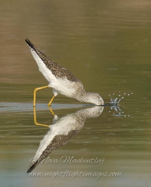 "Yellowlegs feeding © 2008 Nova Mackentley Laguna Atascosa NWR, TX YEF  <div class=""ss-paypal-button""><div class=""ss-paypal-add-to-cart-section""><div class=""ss-paypal-product-options""><h4>Mat Sizes</h4><ul><li><a href=""https://www.paypal.com/cgi-bin/webscr?cmd=_cart&amp;business=T77V5VKCW4K2U&amp;lc=US&amp;item_name=Yellowlegs%20feeding%20%C2%A9%202008%20Nova%20Mackentley%20Laguna%20Atascosa%20NWR%2C%20TX%20YEF&amp;item_number=http%3A%2F%2Fwww.nightflightimages.com%2FGalleries-1%2FShore%2Fi-dgcknMP&amp;button_subtype=products&amp;no_note=0&amp;cn=Add%20special%20instructions%20to%20the%20seller%3A&amp;no_shipping=2&amp;currency_code=USD&amp;weight_unit=lbs&amp;add=1&amp;bn=PP-ShopCartBF%3Abtn_cart_SM.gif%3ANonHosted&amp;on0=Mat%20Sizes&amp;option_select0=5%20x%207&amp;option_amount0=10.00&amp;option_select1=8%20x%2010&amp;option_amount1=18.00&amp;option_select2=11%20x%2014&amp;option_amount2=28.00&amp;option_select3=card&amp;option_amount3=4.00&amp;option_index=0&amp;charset=utf-8&amp;submit=&amp;os0=5%20x%207"" target=""paypal""><span>5 x 7 $11.00 USD</span><img src=""https://www.paypalobjects.com/en_US/i/btn/btn_cart_SM.gif""></a></li><li><a href=""https://www.paypal.com/cgi-bin/webscr?cmd=_cart&amp;business=T77V5VKCW4K2U&amp;lc=US&amp;item_name=Yellowlegs%20feeding%20%C2%A9%202008%20Nova%20Mackentley%20Laguna%20Atascosa%20NWR%2C%20TX%20YEF&amp;item_number=http%3A%2F%2Fwww.nightflightimages.com%2FGalleries-1%2FShore%2Fi-dgcknMP&amp;button_subtype=products&amp;no_note=0&amp;cn=Add%20special%20instructions%20to%20the%20seller%3A&amp;no_shipping=2&amp;currency_code=USD&amp;weight_unit=lbs&amp;add=1&amp;bn=PP-ShopCartBF%3Abtn_cart_SM.gif%3ANonHosted&amp;on0=Mat%20Sizes&amp;option_select0=5%20x%207&amp;option_amount0=10.00&amp;option_select1=8%20x%2010&amp;option_amount1=18.00&amp;option_select2=11%20x%2014&amp;option_amount2=28.00&amp;option_select3=card&amp;option_amount3=4.00&amp;option_index=0&amp;charset=utf-8&amp;submit=&amp;os0=8%20x%2010"" target=""paypal""><span>8 x 10 $19.00 USD</span><img src=""https://www.paypalobjects.com/en_US/i/btn/btn_cart_SM.gif""></a></li><li><a href=""https://www.paypal.com/cgi-bin/webscr?cmd=_cart&amp;business=T77V5VKCW4K2U&amp;lc=US&amp;item_name=Yellowlegs%20feeding%20%C2%A9%202008%20Nova%20Mackentley%20Laguna%20Atascosa%20NWR%2C%20TX%20YEF&amp;item_number=http%3A%2F%2Fwww.nightflightimages.com%2FGalleries-1%2FShore%2Fi-dgcknMP&amp;button_subtype=products&amp;no_note=0&amp;cn=Add%20special%20instructions%20to%20the%20seller%3A&amp;no_shipping=2&amp;currency_code=USD&amp;weight_unit=lbs&amp;add=1&amp;bn=PP-ShopCartBF%3Abtn_cart_SM.gif%3ANonHosted&amp;on0=Mat%20Sizes&amp;option_select0=5%20x%207&amp;option_amount0=10.00&amp;option_select1=8%20x%2010&amp;option_amount1=18.00&amp;option_select2=11%20x%2014&amp;option_amount2=28.00&amp;option_select3=card&amp;option_amount3=4.00&amp;option_index=0&amp;charset=utf-8&amp;submit=&amp;os0=11%20x%2014"" target=""paypal""><span>11 x 14 $29.00 USD</span><img src=""https://www.paypalobjects.com/en_US/i/btn/btn_cart_SM.gif""></a></li><li><a href=""https://www.paypal.com/cgi-bin/webscr?cmd=_cart&amp;business=T77V5VKCW4K2U&amp;lc=US&amp;item_name=Yellowlegs%20feeding%20%C2%A9%202008%20Nova%20Mackentley%20Laguna%20Atascosa%20NWR%2C%20TX%20YEF&amp;item_number=http%3A%2F%2Fwww.nightflightimages.com%2FGalleries-1%2FShore%2Fi-dgcknMP&amp;button_subtype=products&amp;no_note=0&amp;cn=Add%20special%20instructions%20to%20the%20seller%3A&amp;no_shipping=2&amp;currency_code=USD&amp;weight_unit=lbs&amp;add=1&amp;bn=PP-ShopCartBF%3Abtn_cart_SM.gif%3ANonHosted&amp;on0=Mat%20Sizes&amp;option_select0=5%20x%207&amp;option_amount0=10.00&amp;option_select1=8%20x%2010&amp;option_amount1=18.00&amp;option_select2=11%20x%2014&amp;option_amount2=28.00&amp;option_select3=card&amp;option_amount3=4.00&amp;option_index=0&amp;charset=utf-8&amp;submit=&amp;os0=card"" target=""paypal""><span>card $5.00 USD</span><img src=""https://www.paypalobjects.com/en_US/i/btn/btn_cart_SM.gif""></a></li></ul></div></div> <div class=""ss-paypal-view-cart-section""><a href=""https://www.paypal.com/cgi-bin/webscr?cmd=_cart&amp;business=T77V5VKCW4K2U&amp;display=1&amp;item_name=Yellowlegs%20feeding%20%C2%A9%202008%20Nova%20Mackentley%20Laguna%20Atascosa%20NWR%2C%20TX%20YEF&amp;item_number=http%3A%2F%2Fwww.nightflightimages.com%2FGalleries-1%2FShore%2Fi-dgcknMP&amp;charset=utf-8&amp;submit="" target=""paypal"" class=""ss-paypal-submit-button""><img src=""https://www.paypalobjects.com/en_US/i/btn/btn_viewcart_LG.gif""></a></div></div><div class=""ss-paypal-button-end""></div>"