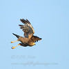 "Roadside Hawk © 2010 C. M. Neri.  Falcon Dam, TX ROHAFL  <div class=""ss-paypal-button""><div class=""ss-paypal-add-to-cart-section""><div class=""ss-paypal-product-options""><h4>Mat Sizes</h4><ul><li><a href=""https://www.paypal.com/cgi-bin/webscr?cmd=_cart&business=T77V5VKCW4K2U&lc=US&item_name=Roadside%20Hawk%20%C2%A9%202010%20C.%20M.%20Neri.%20%20Falcon%20Dam%2C%20TX%20ROHAFL&item_number=http%3A%2F%2Fwww.nightflightimages.com%2FGalleries-1%2FHawks%2Fi-ds7x3zR&button_subtype=products&no_note=0&cn=Add%20special%20instructions%20to%20the%20seller%3A&no_shipping=2&currency_code=USD&weight_unit=lbs&add=1&bn=PP-ShopCartBF%3Abtn_cart_SM.gif%3ANonHosted&on0=Mat%20Sizes&option_select0=5%20x%207&option_amount0=10.00&option_select1=8%20x%2010&option_amount1=18.00&option_select2=11%20x%2014&option_amount2=28.00&option_select3=card&option_amount3=4.00&option_index=0&charset=utf-8&submit=&os0=5%20x%207"" target=""paypal""><span>5 x 7 $11.00 USD</span><img src=""https://www.paypalobjects.com/en_US/i/btn/btn_cart_SM.gif""></a></li><li><a href=""https://www.paypal.com/cgi-bin/webscr?cmd=_cart&business=T77V5VKCW4K2U&lc=US&item_name=Roadside%20Hawk%20%C2%A9%202010%20C.%20M.%20Neri.%20%20Falcon%20Dam%2C%20TX%20ROHAFL&item_number=http%3A%2F%2Fwww.nightflightimages.com%2FGalleries-1%2FHawks%2Fi-ds7x3zR&button_subtype=products&no_note=0&cn=Add%20special%20instructions%20to%20the%20seller%3A&no_shipping=2&currency_code=USD&weight_unit=lbs&add=1&bn=PP-ShopCartBF%3Abtn_cart_SM.gif%3ANonHosted&on0=Mat%20Sizes&option_select0=5%20x%207&option_amount0=10.00&option_select1=8%20x%2010&option_amount1=18.00&option_select2=11%20x%2014&option_amount2=28.00&option_select3=card&option_amount3=4.00&option_index=0&charset=utf-8&submit=&os0=8%20x%2010"" target=""paypal""><span>8 x 10 $19.00 USD</span><img src=""https://www.paypalobjects.com/en_US/i/btn/btn_cart_SM.gif""></a></li><li><a href=""https://www.paypal.com/cgi-bin/webscr?cmd=_cart&business=T77V5VKCW4K2U&lc=US&item_name=Roadside%20Hawk%20%C2%A9%202010%20C.%20M.%20Neri.%20%20Falcon%20Dam%2C%20TX%20ROHAFL&item_number=http%3A%2F%2Fwww.nightflightimages.com%2FGalleries-1%2FHawks%2Fi-ds7x3zR&button_subtype=products&no_note=0&cn=Add%20special%20instructions%20to%20the%20seller%3A&no_shipping=2&currency_code=USD&weight_unit=lbs&add=1&bn=PP-ShopCartBF%3Abtn_cart_SM.gif%3ANonHosted&on0=Mat%20Sizes&option_select0=5%20x%207&option_amount0=10.00&option_select1=8%20x%2010&option_amount1=18.00&option_select2=11%20x%2014&option_amount2=28.00&option_select3=card&option_amount3=4.00&option_index=0&charset=utf-8&submit=&os0=11%20x%2014"" target=""paypal""><span>11 x 14 $29.00 USD</span><img src=""https://www.paypalobjects.com/en_US/i/btn/btn_cart_SM.gif""></a></li><li><a href=""https://www.paypal.com/cgi-bin/webscr?cmd=_cart&business=T77V5VKCW4K2U&lc=US&item_name=Roadside%20Hawk%20%C2%A9%202010%20C.%20M.%20Neri.%20%20Falcon%20Dam%2C%20TX%20ROHAFL&item_number=http%3A%2F%2Fwww.nightflightimages.com%2FGalleries-1%2FHawks%2Fi-ds7x3zR&button_subtype=products&no_note=0&cn=Add%20special%20instructions%20to%20the%20seller%3A&no_shipping=2&currency_code=USD&weight_unit=lbs&add=1&bn=PP-ShopCartBF%3Abtn_cart_SM.gif%3ANonHosted&on0=Mat%20Sizes&option_select0=5%20x%207&option_amount0=10.00&option_select1=8%20x%2010&option_amount1=18.00&option_select2=11%20x%2014&option_amount2=28.00&option_select3=card&option_amount3=4.00&option_index=0&charset=utf-8&submit=&os0=card"" target=""paypal""><span>card $5.00 USD</span><img src=""https://www.paypalobjects.com/en_US/i/btn/btn_cart_SM.gif""></a></li></ul></div></div> <div class=""ss-paypal-view-cart-section""><a href=""https://www.paypal.com/cgi-bin/webscr?cmd=_cart&business=T77V5VKCW4K2U&display=1&item_name=Roadside%20Hawk%20%C2%A9%202010%20C.%20M.%20Neri.%20%20Falcon%20Dam%2C%20TX%20ROHAFL&item_number=http%3A%2F%2Fwww.nightflightimages.com%2FGalleries-1%2FHawks%2Fi-ds7x3zR&charset=utf-8&submit="" target=""paypal"" class=""ss-paypal-submit-button""><img src=""https://www.paypalobjects.com/en_US/i/btn/btn_viewcart_LG.gif""></a></div></div><div class=""ss-paypal-button-end""></div>"