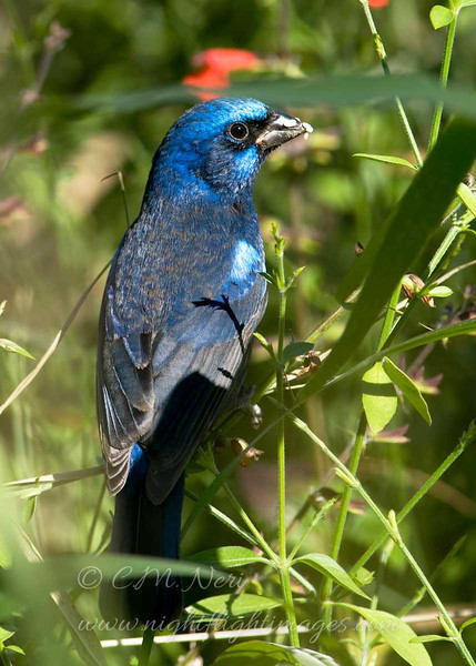 "Blue Bunting male © 2009 C. M. Neri. Laguna Atascosa NWR, TX BLBU  <div class=""ss-paypal-button""> <div class=""ss-paypal-add-to-cart-section""><div class=""ss-paypal-product-options""> <h4>Mat Sizes</h4> <ul> <li><a href=""https://www.paypal.com/cgi-bin/webscr?cmd=_cart&amp;business=T77V5VKCW4K2U&amp;lc=US&amp;item_name=Blue%20Bunting%20male%20%C2%A9%202009%20C.%20M.%20Neri.%20Laguna%20Atascosa%20NWR%2C%20TX%20BLBU&amp;item_number=http%3A%2F%2Fwww.nightflightimages.com%2FGalleries-1%2FLower-Rio-Grande-Valley-TX%2Fi-g2kqNfd&amp;button_subtype=products&amp;no_note=0&amp;cn=Add%20special%20instructions%20to%20the%20seller%3A&amp;no_shipping=2&amp;currency_code=USD&amp;weight_unit=lbs&amp;add=1&amp;bn=PP-ShopCartBF%3Abtn_cart_SM.gif%3ANonHosted&amp;on0=Mat%20Sizes&amp;option_select0=5%20x%207&amp;option_amount0=10.00&amp;option_select1=8%20x%2010&amp;option_amount1=18.00&amp;option_select2=11%20x%2014&amp;option_amount2=28.00&amp;option_select3=card&amp;option_amount3=4.00&amp;option_index=0&amp;submit=&amp;os0=5%20x%207"" target=""paypal""><span>5 x 7 $10.00 USD</span><img src=""https://www.paypalobjects.com/en_US/i/btn/btn_cart_SM.gif""></a></li> <li><a href=""https://www.paypal.com/cgi-bin/webscr?cmd=_cart&amp;business=T77V5VKCW4K2U&amp;lc=US&amp;item_name=Blue%20Bunting%20male%20%C2%A9%202009%20C.%20M.%20Neri.%20Laguna%20Atascosa%20NWR%2C%20TX%20BLBU&amp;item_number=http%3A%2F%2Fwww.nightflightimages.com%2FGalleries-1%2FLower-Rio-Grande-Valley-TX%2Fi-g2kqNfd&amp;button_subtype=products&amp;no_note=0&amp;cn=Add%20special%20instructions%20to%20the%20seller%3A&amp;no_shipping=2&amp;currency_code=USD&amp;weight_unit=lbs&amp;add=1&amp;bn=PP-ShopCartBF%3Abtn_cart_SM.gif%3ANonHosted&amp;on0=Mat%20Sizes&amp;option_select0=5%20x%207&amp;option_amount0=10.00&amp;option_select1=8%20x%2010&amp;option_amount1=18.00&amp;option_select2=11%20x%2014&amp;option_amount2=28.00&amp;option_select3=card&amp;option_amount3=4.00&amp;option_index=0&amp;submit=&amp;os0=8%20x%2010"" target=""paypal""><span>8 x 10 $18.00 USD</span><img src=""https://www.paypalobjects.com/en_US/i/btn/btn_cart_SM.gif""></a></li> <li><a href=""https://www.paypal.com/cgi-bin/webscr?cmd=_cart&amp;business=T77V5VKCW4K2U&amp;lc=US&amp;item_name=Blue%20Bunting%20male%20%C2%A9%202009%20C.%20M.%20Neri.%20Laguna%20Atascosa%20NWR%2C%20TX%20BLBU&amp;item_number=http%3A%2F%2Fwww.nightflightimages.com%2FGalleries-1%2FLower-Rio-Grande-Valley-TX%2Fi-g2kqNfd&amp;button_subtype=products&amp;no_note=0&amp;cn=Add%20special%20instructions%20to%20the%20seller%3A&amp;no_shipping=2&amp;currency_code=USD&amp;weight_unit=lbs&amp;add=1&amp;bn=PP-ShopCartBF%3Abtn_cart_SM.gif%3ANonHosted&amp;on0=Mat%20Sizes&amp;option_select0=5%20x%207&amp;option_amount0=10.00&amp;option_select1=8%20x%2010&amp;option_amount1=18.00&amp;option_select2=11%20x%2014&amp;option_amount2=28.00&amp;option_select3=card&amp;option_amount3=4.00&amp;option_index=0&amp;submit=&amp;os0=11%20x%2014"" target=""paypal""><span>11 x 14 $28.00 USD</span><img src=""https://www.paypalobjects.com/en_US/i/btn/btn_cart_SM.gif""></a></li> <li><a href=""https://www.paypal.com/cgi-bin/webscr?cmd=_cart&amp;business=T77V5VKCW4K2U&amp;lc=US&amp;item_name=Blue%20Bunting%20male%20%C2%A9%202009%20C.%20M.%20Neri.%20Laguna%20Atascosa%20NWR%2C%20TX%20BLBU&amp;item_number=http%3A%2F%2Fwww.nightflightimages.com%2FGalleries-1%2FLower-Rio-Grande-Valley-TX%2Fi-g2kqNfd&amp;button_subtype=products&amp;no_note=0&amp;cn=Add%20special%20instructions%20to%20the%20seller%3A&amp;no_shipping=2&amp;currency_code=USD&amp;weight_unit=lbs&amp;add=1&amp;bn=PP-ShopCartBF%3Abtn_cart_SM.gif%3ANonHosted&amp;on0=Mat%20Sizes&amp;option_select0=5%20x%207&amp;option_amount0=10.00&amp;option_select1=8%20x%2010&amp;option_amount1=18.00&amp;option_select2=11%20x%2014&amp;option_amount2=28.00&amp;option_select3=card&amp;option_amount3=4.00&amp;option_index=0&amp;submit=&amp;os0=card"" target=""paypal""><span>card $4.00 USD</span><img src=""https://www.paypalobjects.com/en_US/i/btn/btn_cart_SM.gif""></a></li> </ul> </div></div> <div class=""ss-paypal-view-cart-section""><a href=""https://www.paypal.com/cgi-bin/webscr?cmd=_cart&amp;business=T77V5VKCW4K2U&amp;display=1&amp;item_name=Blue%20Bunting%20male%20%C2%A9%202009%20C.%20M.%20Neri.%20Laguna%20Atascosa%20NWR%2C%20TX%20BLBU&amp;item_number=http%3A%2F%2Fwww.nightflightimages.com%2FGalleries-1%2FLower-Rio-Grande-Valley-TX%2Fi-g2kqNfd&amp;submit="" target=""paypal"" class=""ss-paypal-submit-button""><img src=""https://www.paypalobjects.com/en_US/i/btn/btn_viewcart_LG.gif""></a></div> </div><div class=""ss-paypal-button-end"" style=""""></div>"