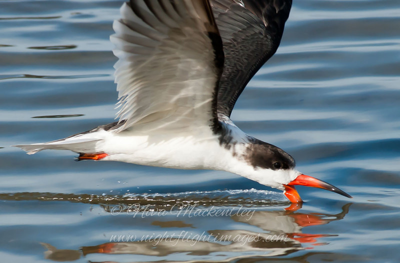 "Black Skimmer © 2010 Nova Mackentley South Padre Island, TX SKC  <div class=""ss-paypal-button""> <div class=""ss-paypal-add-to-cart-section""><div class=""ss-paypal-product-options""> <h4>Mat Sizes</h4> <ul> <li><a href=""https://www.paypal.com/cgi-bin/webscr?cmd=_cart&amp;business=T77V5VKCW4K2U&amp;lc=US&amp;item_name=Black%20Skimmer%20%C2%A9%202010%20Nova%20Mackentley%20South%20Padre%20Island%2C%20TX%20SKC&amp;item_number=http%3A%2F%2Fwww.nightflightimages.com%2FGalleries-1%2FLower-Rio-Grande-Valley-TX%2Fi-gXkM7Fd&amp;button_subtype=products&amp;no_note=0&amp;cn=Add%20special%20instructions%20to%20the%20seller%3A&amp;no_shipping=2&amp;currency_code=USD&amp;weight_unit=lbs&amp;add=1&amp;bn=PP-ShopCartBF%3Abtn_cart_SM.gif%3ANonHosted&amp;on0=Mat%20Sizes&amp;option_select0=5%20x%207&amp;option_amount0=10.00&amp;option_select1=8%20x%2010&amp;option_amount1=18.00&amp;option_select2=11%20x%2014&amp;option_amount2=28.00&amp;option_select3=card&amp;option_amount3=4.00&amp;option_index=0&amp;submit=&amp;os0=5%20x%207"" target=""paypal""><span>5 x 7 $10.00 USD</span><img src=""https://www.paypalobjects.com/en_US/i/btn/btn_cart_SM.gif""></a></li> <li><a href=""https://www.paypal.com/cgi-bin/webscr?cmd=_cart&amp;business=T77V5VKCW4K2U&amp;lc=US&amp;item_name=Black%20Skimmer%20%C2%A9%202010%20Nova%20Mackentley%20South%20Padre%20Island%2C%20TX%20SKC&amp;item_number=http%3A%2F%2Fwww.nightflightimages.com%2FGalleries-1%2FLower-Rio-Grande-Valley-TX%2Fi-gXkM7Fd&amp;button_subtype=products&amp;no_note=0&amp;cn=Add%20special%20instructions%20to%20the%20seller%3A&amp;no_shipping=2&amp;currency_code=USD&amp;weight_unit=lbs&amp;add=1&amp;bn=PP-ShopCartBF%3Abtn_cart_SM.gif%3ANonHosted&amp;on0=Mat%20Sizes&amp;option_select0=5%20x%207&amp;option_amount0=10.00&amp;option_select1=8%20x%2010&amp;option_amount1=18.00&amp;option_select2=11%20x%2014&amp;option_amount2=28.00&amp;option_select3=card&amp;option_amount3=4.00&amp;option_index=0&amp;submit=&amp;os0=8%20x%2010"" target=""paypal""><span>8 x 10 $18.00 USD</span><img src=""https://www.paypalobjects.com/en_US/i/btn/btn_cart_SM.gif""></a></li> <li><a href=""https://www.paypal.com/cgi-bin/webscr?cmd=_cart&amp;business=T77V5VKCW4K2U&amp;lc=US&amp;item_name=Black%20Skimmer%20%C2%A9%202010%20Nova%20Mackentley%20South%20Padre%20Island%2C%20TX%20SKC&amp;item_number=http%3A%2F%2Fwww.nightflightimages.com%2FGalleries-1%2FLower-Rio-Grande-Valley-TX%2Fi-gXkM7Fd&amp;button_subtype=products&amp;no_note=0&amp;cn=Add%20special%20instructions%20to%20the%20seller%3A&amp;no_shipping=2&amp;currency_code=USD&amp;weight_unit=lbs&amp;add=1&amp;bn=PP-ShopCartBF%3Abtn_cart_SM.gif%3ANonHosted&amp;on0=Mat%20Sizes&amp;option_select0=5%20x%207&amp;option_amount0=10.00&amp;option_select1=8%20x%2010&amp;option_amount1=18.00&amp;option_select2=11%20x%2014&amp;option_amount2=28.00&amp;option_select3=card&amp;option_amount3=4.00&amp;option_index=0&amp;submit=&amp;os0=11%20x%2014"" target=""paypal""><span>11 x 14 $28.00 USD</span><img src=""https://www.paypalobjects.com/en_US/i/btn/btn_cart_SM.gif""></a></li> <li><a href=""https://www.paypal.com/cgi-bin/webscr?cmd=_cart&amp;business=T77V5VKCW4K2U&amp;lc=US&amp;item_name=Black%20Skimmer%20%C2%A9%202010%20Nova%20Mackentley%20South%20Padre%20Island%2C%20TX%20SKC&amp;item_number=http%3A%2F%2Fwww.nightflightimages.com%2FGalleries-1%2FLower-Rio-Grande-Valley-TX%2Fi-gXkM7Fd&amp;button_subtype=products&amp;no_note=0&amp;cn=Add%20special%20instructions%20to%20the%20seller%3A&amp;no_shipping=2&amp;currency_code=USD&amp;weight_unit=lbs&amp;add=1&amp;bn=PP-ShopCartBF%3Abtn_cart_SM.gif%3ANonHosted&amp;on0=Mat%20Sizes&amp;option_select0=5%20x%207&amp;option_amount0=10.00&amp;option_select1=8%20x%2010&amp;option_amount1=18.00&amp;option_select2=11%20x%2014&amp;option_amount2=28.00&amp;option_select3=card&amp;option_amount3=4.00&amp;option_index=0&amp;submit=&amp;os0=card"" target=""paypal""><span>card $4.00 USD</span><img src=""https://www.paypalobjects.com/en_US/i/btn/btn_cart_SM.gif""></a></li> </ul> </div></div> <div class=""ss-paypal-view-cart-section""><a href=""https://www.paypal.com/cgi-bin/webscr?cmd=_cart&amp;business=T77V5VKCW4K2U&amp;display=1&amp;item_name=Black%20Skimmer%20%C2%A9%202010%20Nova%20Mackentley%20South%20Padre%20Island%2C%20TX%20SKC&amp;item_number=http%3A%2F%2Fwww.nightflightimages.com%2FGalleries-1%2FLower-Rio-Grande-Valley-TX%2Fi-gXkM7Fd&amp;submit="" target=""paypal"" class=""ss-paypal-submit-button""><img src=""https://www.paypalobjects.com/en_US/i/btn/btn_viewcart_LG.gif""></a></div> </div><div class=""ss-paypal-button-end"" style=""""></div>"