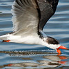 "Black Skimmer © 2010 Nova Mackentley South Padre Island, TX SKC  <div class=""ss-paypal-button""> <div class=""ss-paypal-add-to-cart-section""><div class=""ss-paypal-product-options""> <h4>Mat Sizes</h4> <ul> <li><a href=""https://www.paypal.com/cgi-bin/webscr?cmd=_cart&business=T77V5VKCW4K2U&lc=US&item_name=Black%20Skimmer%20%C2%A9%202010%20Nova%20Mackentley%20South%20Padre%20Island%2C%20TX%20SKC&item_number=http%3A%2F%2Fwww.nightflightimages.com%2FGalleries-1%2FLower-Rio-Grande-Valley-TX%2Fi-gXkM7Fd&button_subtype=products&no_note=0&cn=Add%20special%20instructions%20to%20the%20seller%3A&no_shipping=2&currency_code=USD&weight_unit=lbs&add=1&bn=PP-ShopCartBF%3Abtn_cart_SM.gif%3ANonHosted&on0=Mat%20Sizes&option_select0=5%20x%207&option_amount0=10.00&option_select1=8%20x%2010&option_amount1=18.00&option_select2=11%20x%2014&option_amount2=28.00&option_select3=card&option_amount3=4.00&option_index=0&submit=&os0=5%20x%207"" target=""paypal""><span>5 x 7 $10.00 USD</span><img src=""https://www.paypalobjects.com/en_US/i/btn/btn_cart_SM.gif""></a></li> <li><a href=""https://www.paypal.com/cgi-bin/webscr?cmd=_cart&business=T77V5VKCW4K2U&lc=US&item_name=Black%20Skimmer%20%C2%A9%202010%20Nova%20Mackentley%20South%20Padre%20Island%2C%20TX%20SKC&item_number=http%3A%2F%2Fwww.nightflightimages.com%2FGalleries-1%2FLower-Rio-Grande-Valley-TX%2Fi-gXkM7Fd&button_subtype=products&no_note=0&cn=Add%20special%20instructions%20to%20the%20seller%3A&no_shipping=2&currency_code=USD&weight_unit=lbs&add=1&bn=PP-ShopCartBF%3Abtn_cart_SM.gif%3ANonHosted&on0=Mat%20Sizes&option_select0=5%20x%207&option_amount0=10.00&option_select1=8%20x%2010&option_amount1=18.00&option_select2=11%20x%2014&option_amount2=28.00&option_select3=card&option_amount3=4.00&option_index=0&submit=&os0=8%20x%2010"" target=""paypal""><span>8 x 10 $18.00 USD</span><img src=""https://www.paypalobjects.com/en_US/i/btn/btn_cart_SM.gif""></a></li> <li><a href=""https://www.paypal.com/cgi-bin/webscr?cmd=_cart&business=T77V5VKCW4K2U&lc=US&item_name=Black%20Skimmer%20%C2%A9%202010%20Nova%20Mackentley%20South%20Padre%20Island%2C%20TX%20SKC&item_number=http%3A%2F%2Fwww.nightflightimages.com%2FGalleries-1%2FLower-Rio-Grande-Valley-TX%2Fi-gXkM7Fd&button_subtype=products&no_note=0&cn=Add%20special%20instructions%20to%20the%20seller%3A&no_shipping=2&currency_code=USD&weight_unit=lbs&add=1&bn=PP-ShopCartBF%3Abtn_cart_SM.gif%3ANonHosted&on0=Mat%20Sizes&option_select0=5%20x%207&option_amount0=10.00&option_select1=8%20x%2010&option_amount1=18.00&option_select2=11%20x%2014&option_amount2=28.00&option_select3=card&option_amount3=4.00&option_index=0&submit=&os0=11%20x%2014"" target=""paypal""><span>11 x 14 $28.00 USD</span><img src=""https://www.paypalobjects.com/en_US/i/btn/btn_cart_SM.gif""></a></li> <li><a href=""https://www.paypal.com/cgi-bin/webscr?cmd=_cart&business=T77V5VKCW4K2U&lc=US&item_name=Black%20Skimmer%20%C2%A9%202010%20Nova%20Mackentley%20South%20Padre%20Island%2C%20TX%20SKC&item_number=http%3A%2F%2Fwww.nightflightimages.com%2FGalleries-1%2FLower-Rio-Grande-Valley-TX%2Fi-gXkM7Fd&button_subtype=products&no_note=0&cn=Add%20special%20instructions%20to%20the%20seller%3A&no_shipping=2&currency_code=USD&weight_unit=lbs&add=1&bn=PP-ShopCartBF%3Abtn_cart_SM.gif%3ANonHosted&on0=Mat%20Sizes&option_select0=5%20x%207&option_amount0=10.00&option_select1=8%20x%2010&option_amount1=18.00&option_select2=11%20x%2014&option_amount2=28.00&option_select3=card&option_amount3=4.00&option_index=0&submit=&os0=card"" target=""paypal""><span>card $4.00 USD</span><img src=""https://www.paypalobjects.com/en_US/i/btn/btn_cart_SM.gif""></a></li> </ul> </div></div> <div class=""ss-paypal-view-cart-section""><a href=""https://www.paypal.com/cgi-bin/webscr?cmd=_cart&business=T77V5VKCW4K2U&display=1&item_name=Black%20Skimmer%20%C2%A9%202010%20Nova%20Mackentley%20South%20Padre%20Island%2C%20TX%20SKC&item_number=http%3A%2F%2Fwww.nightflightimages.com%2FGalleries-1%2FLower-Rio-Grande-Valley-TX%2Fi-gXkM7Fd&submit="" target=""paypal"" class=""ss-paypal-submit-button""><img src=""https://www.paypalobjects.com/en_US/i/btn/btn_viewcart_LG.gif""></a></div> </div><div class=""ss-paypal-button-end"" style=""""></div>"