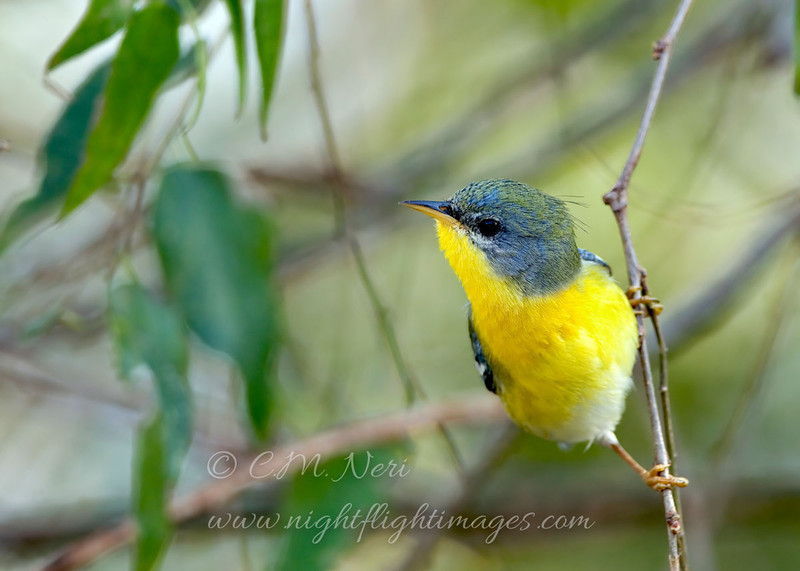 "Possible hybrid Northern/Tropical Parula © 2009 C. M. Neri.  Laguna Atascoca NWR, TX  <div class=""ss-paypal-button""><div class=""ss-paypal-add-to-cart-section""><div class=""ss-paypal-product-options""><h4>Mat Sizes</h4><ul><li><a href=""https://www.paypal.com/cgi-bin/webscr?cmd=_cart&amp;business=T77V5VKCW4K2U&amp;lc=US&amp;item_name=Possible%20hybrid%20Northern%2FTropical%20Parula%20%C2%A9%202009%20C.%20M.%20Neri.%20%20Laguna%20Atascoca%20NWR%2C%20TX&amp;item_number=http%3A%2F%2Fwww.nightflightimages.com%2FGalleries-1%2FWarbler%2Fi-gXvsXZP&amp;button_subtype=products&amp;no_note=0&amp;cn=Add%20special%20instructions%20to%20the%20seller%3A&amp;no_shipping=2&amp;currency_code=USD&amp;weight_unit=lbs&amp;add=1&amp;bn=PP-ShopCartBF%3Abtn_cart_SM.gif%3ANonHosted&amp;on0=Mat%20Sizes&amp;option_select0=5%20x%207&amp;option_amount0=10.00&amp;option_select1=8%20x%2010&amp;option_amount1=18.00&amp;option_select2=11%20x%2014&amp;option_amount2=28.00&amp;option_select3=card&amp;option_amount3=4.00&amp;option_index=0&amp;charset=utf-8&amp;submit=&amp;os0=5%20x%207"" target=""paypal""><span>5 x 7 $11.00 USD</span><img src=""https://www.paypalobjects.com/en_US/i/btn/btn_cart_SM.gif""></a></li><li><a href=""https://www.paypal.com/cgi-bin/webscr?cmd=_cart&amp;business=T77V5VKCW4K2U&amp;lc=US&amp;item_name=Possible%20hybrid%20Northern%2FTropical%20Parula%20%C2%A9%202009%20C.%20M.%20Neri.%20%20Laguna%20Atascoca%20NWR%2C%20TX&amp;item_number=http%3A%2F%2Fwww.nightflightimages.com%2FGalleries-1%2FWarbler%2Fi-gXvsXZP&amp;button_subtype=products&amp;no_note=0&amp;cn=Add%20special%20instructions%20to%20the%20seller%3A&amp;no_shipping=2&amp;currency_code=USD&amp;weight_unit=lbs&amp;add=1&amp;bn=PP-ShopCartBF%3Abtn_cart_SM.gif%3ANonHosted&amp;on0=Mat%20Sizes&amp;option_select0=5%20x%207&amp;option_amount0=10.00&amp;option_select1=8%20x%2010&amp;option_amount1=18.00&amp;option_select2=11%20x%2014&amp;option_amount2=28.00&amp;option_select3=card&amp;option_amount3=4.00&amp;option_index=0&amp;charset=utf-8&amp;submit=&amp;os0=8%20x%2010"" target=""paypal""><span>8 x 10 $19.00 USD</span><img src=""https://www.paypalobjects.com/en_US/i/btn/btn_cart_SM.gif""></a></li><li><a href=""https://www.paypal.com/cgi-bin/webscr?cmd=_cart&amp;business=T77V5VKCW4K2U&amp;lc=US&amp;item_name=Possible%20hybrid%20Northern%2FTropical%20Parula%20%C2%A9%202009%20C.%20M.%20Neri.%20%20Laguna%20Atascoca%20NWR%2C%20TX&amp;item_number=http%3A%2F%2Fwww.nightflightimages.com%2FGalleries-1%2FWarbler%2Fi-gXvsXZP&amp;button_subtype=products&amp;no_note=0&amp;cn=Add%20special%20instructions%20to%20the%20seller%3A&amp;no_shipping=2&amp;currency_code=USD&amp;weight_unit=lbs&amp;add=1&amp;bn=PP-ShopCartBF%3Abtn_cart_SM.gif%3ANonHosted&amp;on0=Mat%20Sizes&amp;option_select0=5%20x%207&amp;option_amount0=10.00&amp;option_select1=8%20x%2010&amp;option_amount1=18.00&amp;option_select2=11%20x%2014&amp;option_amount2=28.00&amp;option_select3=card&amp;option_amount3=4.00&amp;option_index=0&amp;charset=utf-8&amp;submit=&amp;os0=11%20x%2014"" target=""paypal""><span>11 x 14 $29.00 USD</span><img src=""https://www.paypalobjects.com/en_US/i/btn/btn_cart_SM.gif""></a></li><li><a href=""https://www.paypal.com/cgi-bin/webscr?cmd=_cart&amp;business=T77V5VKCW4K2U&amp;lc=US&amp;item_name=Possible%20hybrid%20Northern%2FTropical%20Parula%20%C2%A9%202009%20C.%20M.%20Neri.%20%20Laguna%20Atascoca%20NWR%2C%20TX&amp;item_number=http%3A%2F%2Fwww.nightflightimages.com%2FGalleries-1%2FWarbler%2Fi-gXvsXZP&amp;button_subtype=products&amp;no_note=0&amp;cn=Add%20special%20instructions%20to%20the%20seller%3A&amp;no_shipping=2&amp;currency_code=USD&amp;weight_unit=lbs&amp;add=1&amp;bn=PP-ShopCartBF%3Abtn_cart_SM.gif%3ANonHosted&amp;on0=Mat%20Sizes&amp;option_select0=5%20x%207&amp;option_amount0=10.00&amp;option_select1=8%20x%2010&amp;option_amount1=18.00&amp;option_select2=11%20x%2014&amp;option_amount2=28.00&amp;option_select3=card&amp;option_amount3=4.00&amp;option_index=0&amp;charset=utf-8&amp;submit=&amp;os0=card"" target=""paypal""><span>card $5.00 USD</span><img src=""https://www.paypalobjects.com/en_US/i/btn/btn_cart_SM.gif""></a></li></ul></div></div> <div class=""ss-paypal-view-cart-section""><a href=""https://www.paypal.com/cgi-bin/webscr?cmd=_cart&amp;business=T77V5VKCW4K2U&amp;display=1&amp;item_name=Possible%20hybrid%20Northern%2FTropical%20Parula%20%C2%A9%202009%20C.%20M.%20Neri.%20%20Laguna%20Atascoca%20NWR%2C%20TX&amp;item_number=http%3A%2F%2Fwww.nightflightimages.com%2FGalleries-1%2FWarbler%2Fi-gXvsXZP&amp;charset=utf-8&amp;submit="" target=""paypal"" class=""ss-paypal-submit-button""><img src=""https://www.paypalobjects.com/en_US/i/btn/btn_viewcart_LG.gif""></a></div></div><div class=""ss-paypal-button-end""></div>"