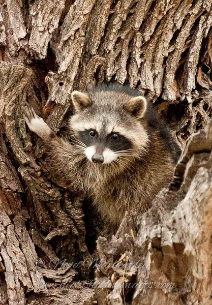 """Young Raccoon just after encounter with Bobcat © 2009 Nova Mackentley Bentsen-Rio Grande State Park, TX RAY  <div class=""""ss-paypal-button""""><div class=""""ss-paypal-add-to-cart-section""""><div class=""""ss-paypal-product-options""""><h4>Mat Sizes</h4><ul><li><a href=""""https://www.paypal.com/cgi-bin/webscr?cmd=_cart&business=T77V5VKCW4K2U&lc=US&item_name=Young%20Raccoon%20just%20after%20encounter%20with%20Bobcat%20%C2%A9%202009%20Nova%20Mackentley%20Bentsen-Rio%20Grande%20State%20Park%2C%20TX%20RAY&item_number=http%3A%2F%2Fwww.nightflightimages.com%2FGalleries-1%2FMammals%2Fi-gvwsLHt&button_subtype=products&no_note=0&cn=Add%20special%20instructions%20to%20the%20seller%3A&no_shipping=2&currency_code=USD&weight_unit=lbs&add=1&bn=PP-ShopCartBF%3Abtn_cart_SM.gif%3ANonHosted&on0=Mat%20Sizes&option_select0=5%20x%207&option_amount0=10.00&option_select1=8%20x%2010&option_amount1=18.00&option_select2=11%20x%2014&option_amount2=28.00&option_select3=card&option_amount3=4.00&option_index=0&charset=utf-8&submit=&os0=5%20x%207"""" target=""""paypal""""><span>5 x 7 $11.00 USD</span><img src=""""https://www.paypalobjects.com/en_US/i/btn/btn_cart_SM.gif""""></a></li><li><a href=""""https://www.paypal.com/cgi-bin/webscr?cmd=_cart&business=T77V5VKCW4K2U&lc=US&item_name=Young%20Raccoon%20just%20after%20encounter%20with%20Bobcat%20%C2%A9%202009%20Nova%20Mackentley%20Bentsen-Rio%20Grande%20State%20Park%2C%20TX%20RAY&item_number=http%3A%2F%2Fwww.nightflightimages.com%2FGalleries-1%2FMammals%2Fi-gvwsLHt&button_subtype=products&no_note=0&cn=Add%20special%20instructions%20to%20the%20seller%3A&no_shipping=2&currency_code=USD&weight_unit=lbs&add=1&bn=PP-ShopCartBF%3Abtn_cart_SM.gif%3ANonHosted&on0=Mat%20Sizes&option_select0=5%20x%207&option_amount0=10.00&option_select1=8%20x%2010&option_amount1=18.00&option_select2=11%20x%2014&option_amount2=28.00&option_select3=card&option_amount3=4.00&option_index=0&charset=utf-8&submit=&os0=8%20x%2010"""" target=""""paypal""""><span>8 x 10 $19.00 USD</span><img src=""""https://www.paypalobjects.com/e"""