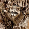 "Young Raccoon just after encounter with Bobcat © 2009 Nova Mackentley Bentsen-Rio Grande State Park, TX RAY  <div class=""ss-paypal-button""><div class=""ss-paypal-add-to-cart-section""><div class=""ss-paypal-product-options""><h4>Mat Sizes</h4><ul><li><a href=""https://www.paypal.com/cgi-bin/webscr?cmd=_cart&business=T77V5VKCW4K2U&lc=US&item_name=Young%20Raccoon%20just%20after%20encounter%20with%20Bobcat%20%C2%A9%202009%20Nova%20Mackentley%20Bentsen-Rio%20Grande%20State%20Park%2C%20TX%20RAY&item_number=http%3A%2F%2Fwww.nightflightimages.com%2FGalleries-1%2FMammals%2Fi-gvwsLHt&button_subtype=products&no_note=0&cn=Add%20special%20instructions%20to%20the%20seller%3A&no_shipping=2&currency_code=USD&weight_unit=lbs&add=1&bn=PP-ShopCartBF%3Abtn_cart_SM.gif%3ANonHosted&on0=Mat%20Sizes&option_select0=5%20x%207&option_amount0=10.00&option_select1=8%20x%2010&option_amount1=18.00&option_select2=11%20x%2014&option_amount2=28.00&option_select3=card&option_amount3=4.00&option_index=0&charset=utf-8&submit=&os0=5%20x%207"" target=""paypal""><span>5 x 7 $11.00 USD</span><img src=""https://www.paypalobjects.com/en_US/i/btn/btn_cart_SM.gif""></a></li><li><a href=""https://www.paypal.com/cgi-bin/webscr?cmd=_cart&business=T77V5VKCW4K2U&lc=US&item_name=Young%20Raccoon%20just%20after%20encounter%20with%20Bobcat%20%C2%A9%202009%20Nova%20Mackentley%20Bentsen-Rio%20Grande%20State%20Park%2C%20TX%20RAY&item_number=http%3A%2F%2Fwww.nightflightimages.com%2FGalleries-1%2FMammals%2Fi-gvwsLHt&button_subtype=products&no_note=0&cn=Add%20special%20instructions%20to%20the%20seller%3A&no_shipping=2&currency_code=USD&weight_unit=lbs&add=1&bn=PP-ShopCartBF%3Abtn_cart_SM.gif%3ANonHosted&on0=Mat%20Sizes&option_select0=5%20x%207&option_amount0=10.00&option_select1=8%20x%2010&option_amount1=18.00&option_select2=11%20x%2014&option_amount2=28.00&option_select3=card&option_amount3=4.00&option_index=0&charset=utf-8&submit=&os0=8%20x%2010"" target=""paypal""><span>8 x 10 $19.00 USD</span><img src=""https://www.paypalobjects.com/en_US/i/btn/btn_cart_SM.gif""></a></li><li><a href=""https://www.paypal.com/cgi-bin/webscr?cmd=_cart&business=T77V5VKCW4K2U&lc=US&item_name=Young%20Raccoon%20just%20after%20encounter%20with%20Bobcat%20%C2%A9%202009%20Nova%20Mackentley%20Bentsen-Rio%20Grande%20State%20Park%2C%20TX%20RAY&item_number=http%3A%2F%2Fwww.nightflightimages.com%2FGalleries-1%2FMammals%2Fi-gvwsLHt&button_subtype=products&no_note=0&cn=Add%20special%20instructions%20to%20the%20seller%3A&no_shipping=2&currency_code=USD&weight_unit=lbs&add=1&bn=PP-ShopCartBF%3Abtn_cart_SM.gif%3ANonHosted&on0=Mat%20Sizes&option_select0=5%20x%207&option_amount0=10.00&option_select1=8%20x%2010&option_amount1=18.00&option_select2=11%20x%2014&option_amount2=28.00&option_select3=card&option_amount3=4.00&option_index=0&charset=utf-8&submit=&os0=11%20x%2014"" target=""paypal""><span>11 x 14 $29.00 USD</span><img src=""https://www.paypalobjects.com/en_US/i/btn/btn_cart_SM.gif""></a></li><li><a href=""https://www.paypal.com/cgi-bin/webscr?cmd=_cart&business=T77V5VKCW4K2U&lc=US&item_name=Young%20Raccoon%20just%20after%20encounter%20with%20Bobcat%20%C2%A9%202009%20Nova%20Mackentley%20Bentsen-Rio%20Grande%20State%20Park%2C%20TX%20RAY&item_number=http%3A%2F%2Fwww.nightflightimages.com%2FGalleries-1%2FMammals%2Fi-gvwsLHt&button_subtype=products&no_note=0&cn=Add%20special%20instructions%20to%20the%20seller%3A&no_shipping=2&currency_code=USD&weight_unit=lbs&add=1&bn=PP-ShopCartBF%3Abtn_cart_SM.gif%3ANonHosted&on0=Mat%20Sizes&option_select0=5%20x%207&option_amount0=10.00&option_select1=8%20x%2010&option_amount1=18.00&option_select2=11%20x%2014&option_amount2=28.00&option_select3=card&option_amount3=4.00&option_index=0&charset=utf-8&submit=&os0=card"" target=""paypal""><span>card $5.00 USD</span><img src=""https://www.paypalobjects.com/en_US/i/btn/btn_cart_SM.gif""></a></li></ul></div></div> <div class=""ss-paypal-view-cart-section""><a href=""https://www.paypal.com/cgi-bin/webscr?cmd=_cart&business=T77V5VKCW4K2U&display=1&item_name=Young%20Raccoon%20just%20after%20encounter%20with%20Bobcat%20%C2%A9%202009%20Nova%20Mackentley%20Bentsen-Rio%20Grande%20State%20Park%2C%20TX%20RAY&item_number=http%3A%2F%2Fwww.nightflightimages.com%2FGalleries-1%2FMammals%2Fi-gvwsLHt&charset=utf-8&submit="" target=""paypal"" class=""ss-paypal-submit-button""><img src=""https://www.paypalobjects.com/en_US/i/btn/btn_viewcart_LG.gif""></a></div></div><div class=""ss-paypal-button-end""></div>"