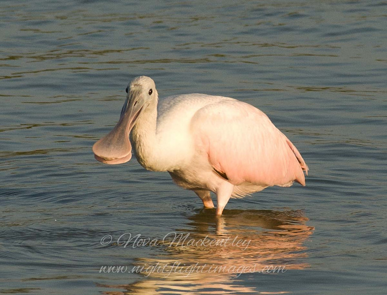 "Spoonbill foraging © 2008 Nova Mackentley Laguna Atascosa NWR, TX SPF  <div class=""ss-paypal-button""> <div class=""ss-paypal-add-to-cart-section""><div class=""ss-paypal-product-options""> <h4>Mat Sizes</h4> <ul> <li><a href=""https://www.paypal.com/cgi-bin/webscr?cmd=_cart&business=T77V5VKCW4K2U&lc=US&item_name=Spoonbill%20foraging%20%C2%A9%202008%20Nova%20Mackentley%20Laguna%20Atascosa%20NWR%2C%20TX%20SPF&item_number=http%3A%2F%2Fwww.nightflightimages.com%2FGalleries-1%2FLower-Rio-Grande-Valley-TX%2Fi-jH3cGd7&button_subtype=products&no_note=0&cn=Add%20special%20instructions%20to%20the%20seller%3A&no_shipping=2&currency_code=USD&weight_unit=lbs&add=1&bn=PP-ShopCartBF%3Abtn_cart_SM.gif%3ANonHosted&on0=Mat%20Sizes&option_select0=5%20x%207&option_amount0=10.00&option_select1=8%20x%2010&option_amount1=18.00&option_select2=11%20x%2014&option_amount2=28.00&option_select3=card&option_amount3=4.00&option_index=0&submit=&os0=5%20x%207"" target=""paypal""><span>5 x 7 $10.00 USD</span><img src=""https://www.paypalobjects.com/en_US/i/btn/btn_cart_SM.gif""></a></li> <li><a href=""https://www.paypal.com/cgi-bin/webscr?cmd=_cart&business=T77V5VKCW4K2U&lc=US&item_name=Spoonbill%20foraging%20%C2%A9%202008%20Nova%20Mackentley%20Laguna%20Atascosa%20NWR%2C%20TX%20SPF&item_number=http%3A%2F%2Fwww.nightflightimages.com%2FGalleries-1%2FLower-Rio-Grande-Valley-TX%2Fi-jH3cGd7&button_subtype=products&no_note=0&cn=Add%20special%20instructions%20to%20the%20seller%3A&no_shipping=2&currency_code=USD&weight_unit=lbs&add=1&bn=PP-ShopCartBF%3Abtn_cart_SM.gif%3ANonHosted&on0=Mat%20Sizes&option_select0=5%20x%207&option_amount0=10.00&option_select1=8%20x%2010&option_amount1=18.00&option_select2=11%20x%2014&option_amount2=28.00&option_select3=card&option_amount3=4.00&option_index=0&submit=&os0=8%20x%2010"" target=""paypal""><span>8 x 10 $18.00 USD</span><img src=""https://www.paypalobjects.com/en_US/i/btn/btn_cart_SM.gif""></a></li> <li><a href=""https://www.paypal.com/cgi-bin/webscr?cmd=_cart&business=T77V5VKCW4K2U&lc=US&item_name=Spoonbill%20foraging%20%C2%A9%202008%20Nova%20Mackentley%20Laguna%20Atascosa%20NWR%2C%20TX%20SPF&item_number=http%3A%2F%2Fwww.nightflightimages.com%2FGalleries-1%2FLower-Rio-Grande-Valley-TX%2Fi-jH3cGd7&button_subtype=products&no_note=0&cn=Add%20special%20instructions%20to%20the%20seller%3A&no_shipping=2&currency_code=USD&weight_unit=lbs&add=1&bn=PP-ShopCartBF%3Abtn_cart_SM.gif%3ANonHosted&on0=Mat%20Sizes&option_select0=5%20x%207&option_amount0=10.00&option_select1=8%20x%2010&option_amount1=18.00&option_select2=11%20x%2014&option_amount2=28.00&option_select3=card&option_amount3=4.00&option_index=0&submit=&os0=11%20x%2014"" target=""paypal""><span>11 x 14 $28.00 USD</span><img src=""https://www.paypalobjects.com/en_US/i/btn/btn_cart_SM.gif""></a></li> <li><a href=""https://www.paypal.com/cgi-bin/webscr?cmd=_cart&business=T77V5VKCW4K2U&lc=US&item_name=Spoonbill%20foraging%20%C2%A9%202008%20Nova%20Mackentley%20Laguna%20Atascosa%20NWR%2C%20TX%20SPF&item_number=http%3A%2F%2Fwww.nightflightimages.com%2FGalleries-1%2FLower-Rio-Grande-Valley-TX%2Fi-jH3cGd7&button_subtype=products&no_note=0&cn=Add%20special%20instructions%20to%20the%20seller%3A&no_shipping=2&currency_code=USD&weight_unit=lbs&add=1&bn=PP-ShopCartBF%3Abtn_cart_SM.gif%3ANonHosted&on0=Mat%20Sizes&option_select0=5%20x%207&option_amount0=10.00&option_select1=8%20x%2010&option_amount1=18.00&option_select2=11%20x%2014&option_amount2=28.00&option_select3=card&option_amount3=4.00&option_index=0&submit=&os0=card"" target=""paypal""><span>card $4.00 USD</span><img src=""https://www.paypalobjects.com/en_US/i/btn/btn_cart_SM.gif""></a></li> </ul> </div></div> <div class=""ss-paypal-view-cart-section""><a href=""https://www.paypal.com/cgi-bin/webscr?cmd=_cart&business=T77V5VKCW4K2U&display=1&item_name=Spoonbill%20foraging%20%C2%A9%202008%20Nova%20Mackentley%20Laguna%20Atascosa%20NWR%2C%20TX%20SPF&item_number=http%3A%2F%2Fwww.nightflightimages.com%2FGalleries-1%2FLower-Rio-Grande-Valley-TX%2Fi-jH3cGd7&submit="" target=""paypal"" class=""ss-paypal-submit-button""><img src=""https://www.paypalobjects.com/en_US/i/btn/btn_viewcart_LG.gif""></a></div> </div><div class=""ss-paypal-button-end"" style=""""></div>"