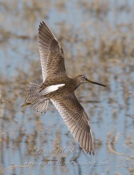 """Dowitcher in flight © 2009 Nova Mackentley Laguna Atascosa NWR, TX DIF  <div class=""""ss-paypal-button""""><div class=""""ss-paypal-add-to-cart-section""""><div class=""""ss-paypal-product-options""""><h4>Mat Sizes</h4><ul><li><a href=""""https://www.paypal.com/cgi-bin/webscr?cmd=_cart&amp;business=T77V5VKCW4K2U&amp;lc=US&amp;item_name=Dowitcher%20in%20flight%20%C2%A9%202009%20Nova%20Mackentley%20Laguna%20Atascosa%20NWR%2C%20TX%20DIF&amp;item_number=http%3A%2F%2Fwww.nightflightimages.com%2FGalleries-1%2FShore%2Fi-jM6Qgts&amp;button_subtype=products&amp;no_note=0&amp;cn=Add%20special%20instructions%20to%20the%20seller%3A&amp;no_shipping=2&amp;currency_code=USD&amp;weight_unit=lbs&amp;add=1&amp;bn=PP-ShopCartBF%3Abtn_cart_SM.gif%3ANonHosted&amp;on0=Mat%20Sizes&amp;option_select0=5%20x%207&amp;option_amount0=10.00&amp;option_select1=8%20x%2010&amp;option_amount1=18.00&amp;option_select2=11%20x%2014&amp;option_amount2=28.00&amp;option_select3=card&amp;option_amount3=4.00&amp;option_index=0&amp;charset=utf-8&amp;submit=&amp;os0=5%20x%207"""" target=""""paypal""""><span>5 x 7 $11.00 USD</span><img src=""""https://www.paypalobjects.com/en_US/i/btn/btn_cart_SM.gif""""></a></li><li><a href=""""https://www.paypal.com/cgi-bin/webscr?cmd=_cart&amp;business=T77V5VKCW4K2U&amp;lc=US&amp;item_name=Dowitcher%20in%20flight%20%C2%A9%202009%20Nova%20Mackentley%20Laguna%20Atascosa%20NWR%2C%20TX%20DIF&amp;item_number=http%3A%2F%2Fwww.nightflightimages.com%2FGalleries-1%2FShore%2Fi-jM6Qgts&amp;button_subtype=products&amp;no_note=0&amp;cn=Add%20special%20instructions%20to%20the%20seller%3A&amp;no_shipping=2&amp;currency_code=USD&amp;weight_unit=lbs&amp;add=1&amp;bn=PP-ShopCartBF%3Abtn_cart_SM.gif%3ANonHosted&amp;on0=Mat%20Sizes&amp;option_select0=5%20x%207&amp;option_amount0=10.00&amp;option_select1=8%20x%2010&amp;option_amount1=18.00&amp;option_select2=11%20x%2014&amp;option_amount2=28.00&amp;option_select3=card&amp;option_amount3=4.00&amp;option_index=0&amp;charset=utf-8&amp;submit=&amp;os0=8%20x%2010"""" target=""""paypal""""><span>"""