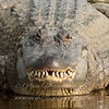"American Alligator © 2010 Nova Mackentley South Padre Island, TX AAF  <div class=""ss-paypal-button""> <div class=""ss-paypal-add-to-cart-section""><div class=""ss-paypal-product-options""> <h4>Mat Sizes</h4> <ul> <li><a href=""https://www.paypal.com/cgi-bin/webscr?cmd=_cart&amp;business=T77V5VKCW4K2U&amp;lc=US&amp;item_name=American%20Alligator%20%C2%A9%202010%20Nova%20Mackentley%20South%20Padre%20Island%2C%20TX%20AAF&amp;item_number=http%3A%2F%2Fwww.nightflightimages.com%2FGalleries-1%2FLower-Rio-Grande-Valley-TX%2Fi-jQqWnC5&amp;button_subtype=products&amp;no_note=0&amp;cn=Add%20special%20instructions%20to%20the%20seller%3A&amp;no_shipping=2&amp;currency_code=USD&amp;weight_unit=lbs&amp;add=1&amp;bn=PP-ShopCartBF%3Abtn_cart_SM.gif%3ANonHosted&amp;on0=Mat%20Sizes&amp;option_select0=5%20x%207&amp;option_amount0=10.00&amp;option_select1=8%20x%2010&amp;option_amount1=18.00&amp;option_select2=11%20x%2014&amp;option_amount2=28.00&amp;option_select3=card&amp;option_amount3=4.00&amp;option_index=0&amp;submit=&amp;os0=5%20x%207"" target=""paypal""><span>5 x 7 $10.00 USD</span><img src=""https://www.paypalobjects.com/en_US/i/btn/btn_cart_SM.gif""></a></li> <li><a href=""https://www.paypal.com/cgi-bin/webscr?cmd=_cart&amp;business=T77V5VKCW4K2U&amp;lc=US&amp;item_name=American%20Alligator%20%C2%A9%202010%20Nova%20Mackentley%20South%20Padre%20Island%2C%20TX%20AAF&amp;item_number=http%3A%2F%2Fwww.nightflightimages.com%2FGalleries-1%2FLower-Rio-Grande-Valley-TX%2Fi-jQqWnC5&amp;button_subtype=products&amp;no_note=0&amp;cn=Add%20special%20instructions%20to%20the%20seller%3A&amp;no_shipping=2&amp;currency_code=USD&amp;weight_unit=lbs&amp;add=1&amp;bn=PP-ShopCartBF%3Abtn_cart_SM.gif%3ANonHosted&amp;on0=Mat%20Sizes&amp;option_select0=5%20x%207&amp;option_amount0=10.00&amp;option_select1=8%20x%2010&amp;option_amount1=18.00&amp;option_select2=11%20x%2014&amp;option_amount2=28.00&amp;option_select3=card&amp;option_amount3=4.00&amp;option_index=0&amp;submit=&amp;os0=8%20x%2010"" target=""paypal""><span>8 x 10 $18.00 USD</span><img src=""https://www.paypalobjects.com/en_US/i/btn/btn_cart_SM.gif""></a></li> <li><a href=""https://www.paypal.com/cgi-bin/webscr?cmd=_cart&amp;business=T77V5VKCW4K2U&amp;lc=US&amp;item_name=American%20Alligator%20%C2%A9%202010%20Nova%20Mackentley%20South%20Padre%20Island%2C%20TX%20AAF&amp;item_number=http%3A%2F%2Fwww.nightflightimages.com%2FGalleries-1%2FLower-Rio-Grande-Valley-TX%2Fi-jQqWnC5&amp;button_subtype=products&amp;no_note=0&amp;cn=Add%20special%20instructions%20to%20the%20seller%3A&amp;no_shipping=2&amp;currency_code=USD&amp;weight_unit=lbs&amp;add=1&amp;bn=PP-ShopCartBF%3Abtn_cart_SM.gif%3ANonHosted&amp;on0=Mat%20Sizes&amp;option_select0=5%20x%207&amp;option_amount0=10.00&amp;option_select1=8%20x%2010&amp;option_amount1=18.00&amp;option_select2=11%20x%2014&amp;option_amount2=28.00&amp;option_select3=card&amp;option_amount3=4.00&amp;option_index=0&amp;submit=&amp;os0=11%20x%2014"" target=""paypal""><span>11 x 14 $28.00 USD</span><img src=""https://www.paypalobjects.com/en_US/i/btn/btn_cart_SM.gif""></a></li> <li><a href=""https://www.paypal.com/cgi-bin/webscr?cmd=_cart&amp;business=T77V5VKCW4K2U&amp;lc=US&amp;item_name=American%20Alligator%20%C2%A9%202010%20Nova%20Mackentley%20South%20Padre%20Island%2C%20TX%20AAF&amp;item_number=http%3A%2F%2Fwww.nightflightimages.com%2FGalleries-1%2FLower-Rio-Grande-Valley-TX%2Fi-jQqWnC5&amp;button_subtype=products&amp;no_note=0&amp;cn=Add%20special%20instructions%20to%20the%20seller%3A&amp;no_shipping=2&amp;currency_code=USD&amp;weight_unit=lbs&amp;add=1&amp;bn=PP-ShopCartBF%3Abtn_cart_SM.gif%3ANonHosted&amp;on0=Mat%20Sizes&amp;option_select0=5%20x%207&amp;option_amount0=10.00&amp;option_select1=8%20x%2010&amp;option_amount1=18.00&amp;option_select2=11%20x%2014&amp;option_amount2=28.00&amp;option_select3=card&amp;option_amount3=4.00&amp;option_index=0&amp;submit=&amp;os0=card"" target=""paypal""><span>card $4.00 USD</span><img src=""https://www.paypalobjects.com/en_US/i/btn/btn_cart_SM.gif""></a></li> </ul> </div></div> <div class=""ss-paypal-view-cart-section""><a href=""https://www.paypal.com/cgi-bin/webscr?cmd=_cart&amp;business=T77V5VKCW4K2U&amp;display=1&amp;item_name=American%20Alligator%20%C2%A9%202010%20Nova%20Mackentley%20South%20Padre%20Island%2C%20TX%20AAF&amp;item_number=http%3A%2F%2Fwww.nightflightimages.com%2FGalleries-1%2FLower-Rio-Grande-Valley-TX%2Fi-jQqWnC5&amp;submit="" target=""paypal"" class=""ss-paypal-submit-button""><img src=""https://www.paypalobjects.com/en_US/i/btn/btn_viewcart_LG.gif""></a></div> </div><div class=""ss-paypal-button-end"" style=""""></div>"
