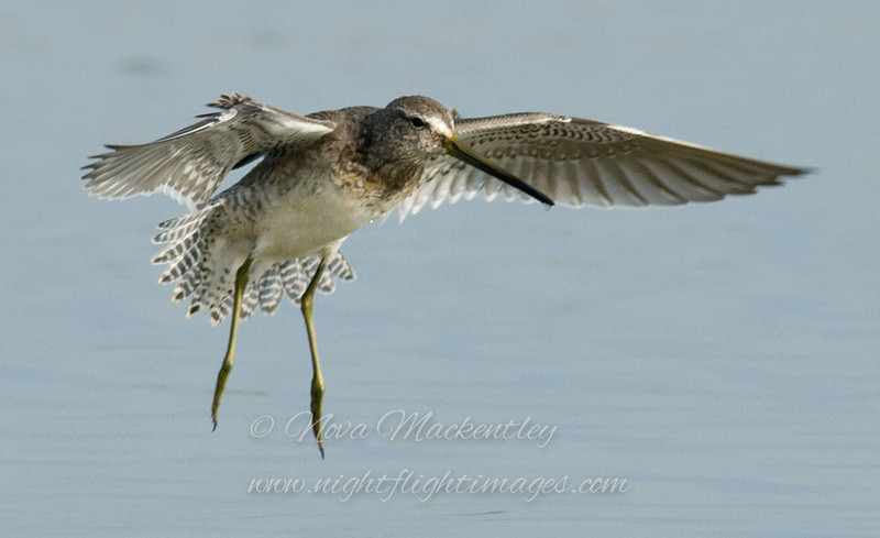 """Dowitcher in flight © 2008 Nova Mackentley Laguna Atascosa NWR, TX DF2  <div class=""""ss-paypal-button""""><div class=""""ss-paypal-add-to-cart-section""""><div class=""""ss-paypal-product-options""""><h4>Mat Sizes</h4><ul><li><a href=""""https://www.paypal.com/cgi-bin/webscr?cmd=_cart&amp;business=T77V5VKCW4K2U&amp;lc=US&amp;item_name=Dowitcher%20in%20flight%20%C2%A9%202008%20Nova%20Mackentley%20Laguna%20Atascosa%20NWR%2C%20TX%20DF2&amp;item_number=http%3A%2F%2Fwww.nightflightimages.com%2FGalleries-1%2FShore%2Fi-jbqc69x&amp;button_subtype=products&amp;no_note=0&amp;cn=Add%20special%20instructions%20to%20the%20seller%3A&amp;no_shipping=2&amp;currency_code=USD&amp;weight_unit=lbs&amp;add=1&amp;bn=PP-ShopCartBF%3Abtn_cart_SM.gif%3ANonHosted&amp;on0=Mat%20Sizes&amp;option_select0=5%20x%207&amp;option_amount0=10.00&amp;option_select1=8%20x%2010&amp;option_amount1=18.00&amp;option_select2=11%20x%2014&amp;option_amount2=28.00&amp;option_select3=card&amp;option_amount3=4.00&amp;option_index=0&amp;charset=utf-8&amp;submit=&amp;os0=5%20x%207"""" target=""""paypal""""><span>5 x 7 $11.00 USD</span><img src=""""https://www.paypalobjects.com/en_US/i/btn/btn_cart_SM.gif""""></a></li><li><a href=""""https://www.paypal.com/cgi-bin/webscr?cmd=_cart&amp;business=T77V5VKCW4K2U&amp;lc=US&amp;item_name=Dowitcher%20in%20flight%20%C2%A9%202008%20Nova%20Mackentley%20Laguna%20Atascosa%20NWR%2C%20TX%20DF2&amp;item_number=http%3A%2F%2Fwww.nightflightimages.com%2FGalleries-1%2FShore%2Fi-jbqc69x&amp;button_subtype=products&amp;no_note=0&amp;cn=Add%20special%20instructions%20to%20the%20seller%3A&amp;no_shipping=2&amp;currency_code=USD&amp;weight_unit=lbs&amp;add=1&amp;bn=PP-ShopCartBF%3Abtn_cart_SM.gif%3ANonHosted&amp;on0=Mat%20Sizes&amp;option_select0=5%20x%207&amp;option_amount0=10.00&amp;option_select1=8%20x%2010&amp;option_amount1=18.00&amp;option_select2=11%20x%2014&amp;option_amount2=28.00&amp;option_select3=card&amp;option_amount3=4.00&amp;option_index=0&amp;charset=utf-8&amp;submit=&amp;os0=8%20x%2010"""" target=""""paypal""""><span>"""