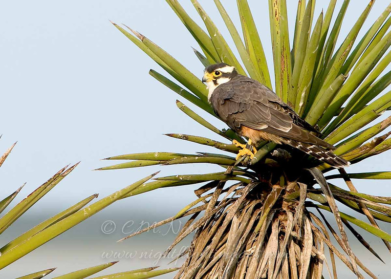 "Aplomado Falcon © 2009 C. M. Neri.  Laguna Atascosa NWR, TX APFA  <div class=""ss-paypal-button""><div class=""ss-paypal-add-to-cart-section""><div class=""ss-paypal-product-options""><h4>Mat Sizes</h4><ul><li><a href=""https://www.paypal.com/cgi-bin/webscr?cmd=_cart&amp;business=T77V5VKCW4K2U&amp;lc=US&amp;item_name=Aplomado%20Falcon%20%C2%A9%202009%20C.%20M.%20Neri.%20%20Laguna%20Atascosa%20NWR%2C%20TX%20APFA&amp;item_number=http%3A%2F%2Fwww.nightflightimages.com%2FGalleries-1%2FHawks%2Fi-kPHvM9s&amp;button_subtype=products&amp;no_note=0&amp;cn=Add%20special%20instructions%20to%20the%20seller%3A&amp;no_shipping=2&amp;currency_code=USD&amp;weight_unit=lbs&amp;add=1&amp;bn=PP-ShopCartBF%3Abtn_cart_SM.gif%3ANonHosted&amp;on0=Mat%20Sizes&amp;option_select0=5%20x%207&amp;option_amount0=10.00&amp;option_select1=8%20x%2010&amp;option_amount1=18.00&amp;option_select2=11%20x%2014&amp;option_amount2=28.00&amp;option_select3=card&amp;option_amount3=4.00&amp;option_index=0&amp;charset=utf-8&amp;submit=&amp;os0=5%20x%207"" target=""paypal""><span>5 x 7 $11.00 USD</span><img src=""https://www.paypalobjects.com/en_US/i/btn/btn_cart_SM.gif""></a></li><li><a href=""https://www.paypal.com/cgi-bin/webscr?cmd=_cart&amp;business=T77V5VKCW4K2U&amp;lc=US&amp;item_name=Aplomado%20Falcon%20%C2%A9%202009%20C.%20M.%20Neri.%20%20Laguna%20Atascosa%20NWR%2C%20TX%20APFA&amp;item_number=http%3A%2F%2Fwww.nightflightimages.com%2FGalleries-1%2FHawks%2Fi-kPHvM9s&amp;button_subtype=products&amp;no_note=0&amp;cn=Add%20special%20instructions%20to%20the%20seller%3A&amp;no_shipping=2&amp;currency_code=USD&amp;weight_unit=lbs&amp;add=1&amp;bn=PP-ShopCartBF%3Abtn_cart_SM.gif%3ANonHosted&amp;on0=Mat%20Sizes&amp;option_select0=5%20x%207&amp;option_amount0=10.00&amp;option_select1=8%20x%2010&amp;option_amount1=18.00&amp;option_select2=11%20x%2014&amp;option_amount2=28.00&amp;option_select3=card&amp;option_amount3=4.00&amp;option_index=0&amp;charset=utf-8&amp;submit=&amp;os0=8%20x%2010"" target=""paypal""><span>8 x 10 $19.00 USD</span><img src=""https://www.paypalobjects.com/en_US/i/btn/btn_cart_SM.gif""></a></li><li><a href=""https://www.paypal.com/cgi-bin/webscr?cmd=_cart&amp;business=T77V5VKCW4K2U&amp;lc=US&amp;item_name=Aplomado%20Falcon%20%C2%A9%202009%20C.%20M.%20Neri.%20%20Laguna%20Atascosa%20NWR%2C%20TX%20APFA&amp;item_number=http%3A%2F%2Fwww.nightflightimages.com%2FGalleries-1%2FHawks%2Fi-kPHvM9s&amp;button_subtype=products&amp;no_note=0&amp;cn=Add%20special%20instructions%20to%20the%20seller%3A&amp;no_shipping=2&amp;currency_code=USD&amp;weight_unit=lbs&amp;add=1&amp;bn=PP-ShopCartBF%3Abtn_cart_SM.gif%3ANonHosted&amp;on0=Mat%20Sizes&amp;option_select0=5%20x%207&amp;option_amount0=10.00&amp;option_select1=8%20x%2010&amp;option_amount1=18.00&amp;option_select2=11%20x%2014&amp;option_amount2=28.00&amp;option_select3=card&amp;option_amount3=4.00&amp;option_index=0&amp;charset=utf-8&amp;submit=&amp;os0=11%20x%2014"" target=""paypal""><span>11 x 14 $29.00 USD</span><img src=""https://www.paypalobjects.com/en_US/i/btn/btn_cart_SM.gif""></a></li><li><a href=""https://www.paypal.com/cgi-bin/webscr?cmd=_cart&amp;business=T77V5VKCW4K2U&amp;lc=US&amp;item_name=Aplomado%20Falcon%20%C2%A9%202009%20C.%20M.%20Neri.%20%20Laguna%20Atascosa%20NWR%2C%20TX%20APFA&amp;item_number=http%3A%2F%2Fwww.nightflightimages.com%2FGalleries-1%2FHawks%2Fi-kPHvM9s&amp;button_subtype=products&amp;no_note=0&amp;cn=Add%20special%20instructions%20to%20the%20seller%3A&amp;no_shipping=2&amp;currency_code=USD&amp;weight_unit=lbs&amp;add=1&amp;bn=PP-ShopCartBF%3Abtn_cart_SM.gif%3ANonHosted&amp;on0=Mat%20Sizes&amp;option_select0=5%20x%207&amp;option_amount0=10.00&amp;option_select1=8%20x%2010&amp;option_amount1=18.00&amp;option_select2=11%20x%2014&amp;option_amount2=28.00&amp;option_select3=card&amp;option_amount3=4.00&amp;option_index=0&amp;charset=utf-8&amp;submit=&amp;os0=card"" target=""paypal""><span>card $5.00 USD</span><img src=""https://www.paypalobjects.com/en_US/i/btn/btn_cart_SM.gif""></a></li></ul></div></div> <div class=""ss-paypal-view-cart-section""><a href=""https://www.paypal.com/cgi-bin/webscr?cmd=_cart&amp;business=T77V5VKCW4K2U&amp;display=1&amp;item_name=Aplomado%20Falcon%20%C2%A9%202009%20C.%20M.%20Neri.%20%20Laguna%20Atascosa%20NWR%2C%20TX%20APFA&amp;item_number=http%3A%2F%2Fwww.nightflightimages.com%2FGalleries-1%2FHawks%2Fi-kPHvM9s&amp;charset=utf-8&amp;submit="" target=""paypal"" class=""ss-paypal-submit-button""><img src=""https://www.paypalobjects.com/en_US/i/btn/btn_viewcart_LG.gif""></a></div></div><div class=""ss-paypal-button-end""></div>"
