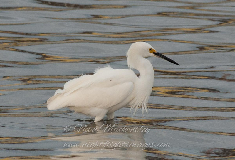 "Snowy Egret © 2007 Nova Mackentley South Padre Island, TX SNE  <div class=""ss-paypal-button""> <div class=""ss-paypal-add-to-cart-section""><div class=""ss-paypal-product-options""> <h4>Mat Sizes</h4> <ul> <li><a href=""https://www.paypal.com/cgi-bin/webscr?cmd=_cart&amp;business=T77V5VKCW4K2U&amp;lc=US&amp;item_name=Snowy%20Egret%20%C2%A9%202007%20Nova%20Mackentley%20South%20Padre%20Island%2C%20TX%20SNE&amp;item_number=http%3A%2F%2Fwww.nightflightimages.com%2FGalleries-1%2FLower-Rio-Grande-Valley-TX%2Fi-mC888sQ&amp;button_subtype=products&amp;no_note=0&amp;cn=Add%20special%20instructions%20to%20the%20seller%3A&amp;no_shipping=2&amp;currency_code=USD&amp;weight_unit=lbs&amp;add=1&amp;bn=PP-ShopCartBF%3Abtn_cart_SM.gif%3ANonHosted&amp;on0=Mat%20Sizes&amp;option_select0=5%20x%207&amp;option_amount0=10.00&amp;option_select1=8%20x%2010&amp;option_amount1=18.00&amp;option_select2=11%20x%2014&amp;option_amount2=28.00&amp;option_select3=card&amp;option_amount3=4.00&amp;option_index=0&amp;submit=&amp;os0=5%20x%207"" target=""paypal""><span>5 x 7 $10.00 USD</span><img src=""https://www.paypalobjects.com/en_US/i/btn/btn_cart_SM.gif""></a></li> <li><a href=""https://www.paypal.com/cgi-bin/webscr?cmd=_cart&amp;business=T77V5VKCW4K2U&amp;lc=US&amp;item_name=Snowy%20Egret%20%C2%A9%202007%20Nova%20Mackentley%20South%20Padre%20Island%2C%20TX%20SNE&amp;item_number=http%3A%2F%2Fwww.nightflightimages.com%2FGalleries-1%2FLower-Rio-Grande-Valley-TX%2Fi-mC888sQ&amp;button_subtype=products&amp;no_note=0&amp;cn=Add%20special%20instructions%20to%20the%20seller%3A&amp;no_shipping=2&amp;currency_code=USD&amp;weight_unit=lbs&amp;add=1&amp;bn=PP-ShopCartBF%3Abtn_cart_SM.gif%3ANonHosted&amp;on0=Mat%20Sizes&amp;option_select0=5%20x%207&amp;option_amount0=10.00&amp;option_select1=8%20x%2010&amp;option_amount1=18.00&amp;option_select2=11%20x%2014&amp;option_amount2=28.00&amp;option_select3=card&amp;option_amount3=4.00&amp;option_index=0&amp;submit=&amp;os0=8%20x%2010"" target=""paypal""><span>8 x 10 $18.00 USD</span><img src=""https://www.paypalobjects.com/en_US/i/btn/btn_cart_SM.gif""></a></li> <li><a href=""https://www.paypal.com/cgi-bin/webscr?cmd=_cart&amp;business=T77V5VKCW4K2U&amp;lc=US&amp;item_name=Snowy%20Egret%20%C2%A9%202007%20Nova%20Mackentley%20South%20Padre%20Island%2C%20TX%20SNE&amp;item_number=http%3A%2F%2Fwww.nightflightimages.com%2FGalleries-1%2FLower-Rio-Grande-Valley-TX%2Fi-mC888sQ&amp;button_subtype=products&amp;no_note=0&amp;cn=Add%20special%20instructions%20to%20the%20seller%3A&amp;no_shipping=2&amp;currency_code=USD&amp;weight_unit=lbs&amp;add=1&amp;bn=PP-ShopCartBF%3Abtn_cart_SM.gif%3ANonHosted&amp;on0=Mat%20Sizes&amp;option_select0=5%20x%207&amp;option_amount0=10.00&amp;option_select1=8%20x%2010&amp;option_amount1=18.00&amp;option_select2=11%20x%2014&amp;option_amount2=28.00&amp;option_select3=card&amp;option_amount3=4.00&amp;option_index=0&amp;submit=&amp;os0=11%20x%2014"" target=""paypal""><span>11 x 14 $28.00 USD</span><img src=""https://www.paypalobjects.com/en_US/i/btn/btn_cart_SM.gif""></a></li> <li><a href=""https://www.paypal.com/cgi-bin/webscr?cmd=_cart&amp;business=T77V5VKCW4K2U&amp;lc=US&amp;item_name=Snowy%20Egret%20%C2%A9%202007%20Nova%20Mackentley%20South%20Padre%20Island%2C%20TX%20SNE&amp;item_number=http%3A%2F%2Fwww.nightflightimages.com%2FGalleries-1%2FLower-Rio-Grande-Valley-TX%2Fi-mC888sQ&amp;button_subtype=products&amp;no_note=0&amp;cn=Add%20special%20instructions%20to%20the%20seller%3A&amp;no_shipping=2&amp;currency_code=USD&amp;weight_unit=lbs&amp;add=1&amp;bn=PP-ShopCartBF%3Abtn_cart_SM.gif%3ANonHosted&amp;on0=Mat%20Sizes&amp;option_select0=5%20x%207&amp;option_amount0=10.00&amp;option_select1=8%20x%2010&amp;option_amount1=18.00&amp;option_select2=11%20x%2014&amp;option_amount2=28.00&amp;option_select3=card&amp;option_amount3=4.00&amp;option_index=0&amp;submit=&amp;os0=card"" target=""paypal""><span>card $4.00 USD</span><img src=""https://www.paypalobjects.com/en_US/i/btn/btn_cart_SM.gif""></a></li> </ul> </div></div> <div class=""ss-paypal-view-cart-section""><a href=""https://www.paypal.com/cgi-bin/webscr?cmd=_cart&amp;business=T77V5VKCW4K2U&amp;display=1&amp;item_name=Snowy%20Egret%20%C2%A9%202007%20Nova%20Mackentley%20South%20Padre%20Island%2C%20TX%20SNE&amp;item_number=http%3A%2F%2Fwww.nightflightimages.com%2FGalleries-1%2FLower-Rio-Grande-Valley-TX%2Fi-mC888sQ&amp;submit="" target=""paypal"" class=""ss-paypal-submit-button""><img src=""https://www.paypalobjects.com/en_US/i/btn/btn_viewcart_LG.gif""></a></div> </div><div class=""ss-paypal-button-end"" style=""""></div>"