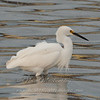 "Snowy Egret © 2007 Nova Mackentley South Padre Island, TX SNE  <div class=""ss-paypal-button""> <div class=""ss-paypal-add-to-cart-section""><div class=""ss-paypal-product-options""> <h4>Mat Sizes</h4> <ul> <li><a href=""https://www.paypal.com/cgi-bin/webscr?cmd=_cart&business=T77V5VKCW4K2U&lc=US&item_name=Snowy%20Egret%20%C2%A9%202007%20Nova%20Mackentley%20South%20Padre%20Island%2C%20TX%20SNE&item_number=http%3A%2F%2Fwww.nightflightimages.com%2FGalleries-1%2FLower-Rio-Grande-Valley-TX%2Fi-mC888sQ&button_subtype=products&no_note=0&cn=Add%20special%20instructions%20to%20the%20seller%3A&no_shipping=2&currency_code=USD&weight_unit=lbs&add=1&bn=PP-ShopCartBF%3Abtn_cart_SM.gif%3ANonHosted&on0=Mat%20Sizes&option_select0=5%20x%207&option_amount0=10.00&option_select1=8%20x%2010&option_amount1=18.00&option_select2=11%20x%2014&option_amount2=28.00&option_select3=card&option_amount3=4.00&option_index=0&submit=&os0=5%20x%207"" target=""paypal""><span>5 x 7 $10.00 USD</span><img src=""https://www.paypalobjects.com/en_US/i/btn/btn_cart_SM.gif""></a></li> <li><a href=""https://www.paypal.com/cgi-bin/webscr?cmd=_cart&business=T77V5VKCW4K2U&lc=US&item_name=Snowy%20Egret%20%C2%A9%202007%20Nova%20Mackentley%20South%20Padre%20Island%2C%20TX%20SNE&item_number=http%3A%2F%2Fwww.nightflightimages.com%2FGalleries-1%2FLower-Rio-Grande-Valley-TX%2Fi-mC888sQ&button_subtype=products&no_note=0&cn=Add%20special%20instructions%20to%20the%20seller%3A&no_shipping=2&currency_code=USD&weight_unit=lbs&add=1&bn=PP-ShopCartBF%3Abtn_cart_SM.gif%3ANonHosted&on0=Mat%20Sizes&option_select0=5%20x%207&option_amount0=10.00&option_select1=8%20x%2010&option_amount1=18.00&option_select2=11%20x%2014&option_amount2=28.00&option_select3=card&option_amount3=4.00&option_index=0&submit=&os0=8%20x%2010"" target=""paypal""><span>8 x 10 $18.00 USD</span><img src=""https://www.paypalobjects.com/en_US/i/btn/btn_cart_SM.gif""></a></li> <li><a href=""https://www.paypal.com/cgi-bin/webscr?cmd=_cart&business=T77V5VKCW4K2U&lc=US&item_name=Snowy%20Egret%20%C2%A9%202007%20Nova%20Mackentley%20South%20Padre%20Island%2C%20TX%20SNE&item_number=http%3A%2F%2Fwww.nightflightimages.com%2FGalleries-1%2FLower-Rio-Grande-Valley-TX%2Fi-mC888sQ&button_subtype=products&no_note=0&cn=Add%20special%20instructions%20to%20the%20seller%3A&no_shipping=2&currency_code=USD&weight_unit=lbs&add=1&bn=PP-ShopCartBF%3Abtn_cart_SM.gif%3ANonHosted&on0=Mat%20Sizes&option_select0=5%20x%207&option_amount0=10.00&option_select1=8%20x%2010&option_amount1=18.00&option_select2=11%20x%2014&option_amount2=28.00&option_select3=card&option_amount3=4.00&option_index=0&submit=&os0=11%20x%2014"" target=""paypal""><span>11 x 14 $28.00 USD</span><img src=""https://www.paypalobjects.com/en_US/i/btn/btn_cart_SM.gif""></a></li> <li><a href=""https://www.paypal.com/cgi-bin/webscr?cmd=_cart&business=T77V5VKCW4K2U&lc=US&item_name=Snowy%20Egret%20%C2%A9%202007%20Nova%20Mackentley%20South%20Padre%20Island%2C%20TX%20SNE&item_number=http%3A%2F%2Fwww.nightflightimages.com%2FGalleries-1%2FLower-Rio-Grande-Valley-TX%2Fi-mC888sQ&button_subtype=products&no_note=0&cn=Add%20special%20instructions%20to%20the%20seller%3A&no_shipping=2&currency_code=USD&weight_unit=lbs&add=1&bn=PP-ShopCartBF%3Abtn_cart_SM.gif%3ANonHosted&on0=Mat%20Sizes&option_select0=5%20x%207&option_amount0=10.00&option_select1=8%20x%2010&option_amount1=18.00&option_select2=11%20x%2014&option_amount2=28.00&option_select3=card&option_amount3=4.00&option_index=0&submit=&os0=card"" target=""paypal""><span>card $4.00 USD</span><img src=""https://www.paypalobjects.com/en_US/i/btn/btn_cart_SM.gif""></a></li> </ul> </div></div> <div class=""ss-paypal-view-cart-section""><a href=""https://www.paypal.com/cgi-bin/webscr?cmd=_cart&business=T77V5VKCW4K2U&display=1&item_name=Snowy%20Egret%20%C2%A9%202007%20Nova%20Mackentley%20South%20Padre%20Island%2C%20TX%20SNE&item_number=http%3A%2F%2Fwww.nightflightimages.com%2FGalleries-1%2FLower-Rio-Grande-Valley-TX%2Fi-mC888sQ&submit="" target=""paypal"" class=""ss-paypal-submit-button""><img src=""https://www.paypalobjects.com/en_US/i/btn/btn_viewcart_LG.gif""></a></div> </div><div class=""ss-paypal-button-end"" style=""""></div>"