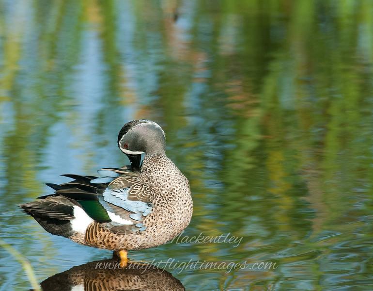 Blue-winged Teal © 2010 Nova Mackentley<br /> South Padre Island, TX<br /> BWT