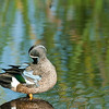 Blue-winged Teal © 2010 Nova Mackentley<br /> South Padre Island, TX<br /> BWT