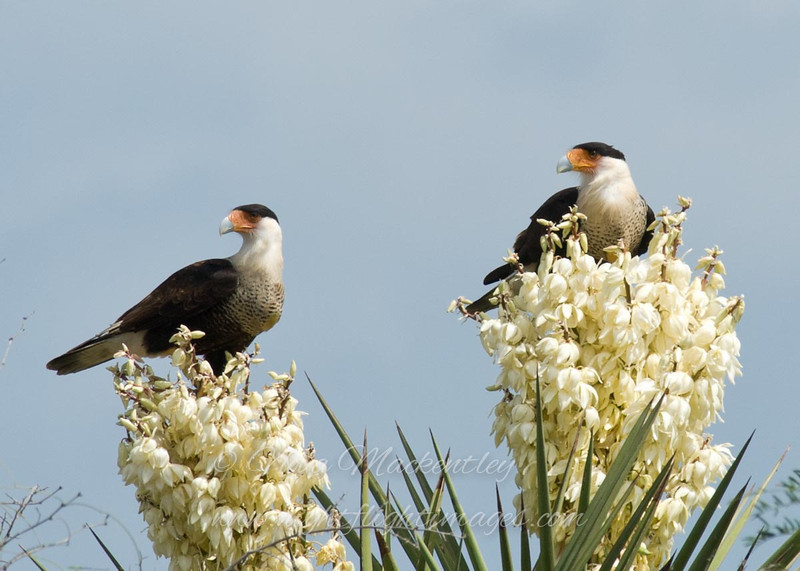 "Caracaras on Flowering Yucca © 2009 Nova Mackentley Laguna Atascosa NWR, TX CA2  <div class=""ss-paypal-button""><div class=""ss-paypal-add-to-cart-section""><div class=""ss-paypal-product-options""><h4>Mat Sizes</h4><ul><li><a href=""https://www.paypal.com/cgi-bin/webscr?cmd=_cart&business=T77V5VKCW4K2U&lc=US&item_name=Caracaras%20on%20Flowering%20Yucca%20%C2%A9%202009%20Nova%20Mackentley%20Laguna%20Atascosa%20NWR%2C%20TX%20CA2&item_number=http%3A%2F%2Fwww.nightflightimages.com%2FGalleries-1%2FHawks%2Fi-mzBzXz2&button_subtype=products&no_note=0&cn=Add%20special%20instructions%20to%20the%20seller%3A&no_shipping=2&currency_code=USD&weight_unit=lbs&add=1&bn=PP-ShopCartBF%3Abtn_cart_SM.gif%3ANonHosted&on0=Mat%20Sizes&option_select0=5%20x%207&option_amount0=10.00&option_select1=8%20x%2010&option_amount1=18.00&option_select2=11%20x%2014&option_amount2=28.00&option_select3=card&option_amount3=4.00&option_index=0&charset=utf-8&submit=&os0=5%20x%207"" target=""paypal""><span>5 x 7 $11.00 USD</span><img src=""https://www.paypalobjects.com/en_US/i/btn/btn_cart_SM.gif""></a></li><li><a href=""https://www.paypal.com/cgi-bin/webscr?cmd=_cart&business=T77V5VKCW4K2U&lc=US&item_name=Caracaras%20on%20Flowering%20Yucca%20%C2%A9%202009%20Nova%20Mackentley%20Laguna%20Atascosa%20NWR%2C%20TX%20CA2&item_number=http%3A%2F%2Fwww.nightflightimages.com%2FGalleries-1%2FHawks%2Fi-mzBzXz2&button_subtype=products&no_note=0&cn=Add%20special%20instructions%20to%20the%20seller%3A&no_shipping=2&currency_code=USD&weight_unit=lbs&add=1&bn=PP-ShopCartBF%3Abtn_cart_SM.gif%3ANonHosted&on0=Mat%20Sizes&option_select0=5%20x%207&option_amount0=10.00&option_select1=8%20x%2010&option_amount1=18.00&option_select2=11%20x%2014&option_amount2=28.00&option_select3=card&option_amount3=4.00&option_index=0&charset=utf-8&submit=&os0=8%20x%2010"" target=""paypal""><span>8 x 10 $19.00 USD</span><img src=""https://www.paypalobjects.com/en_US/i/btn/btn_cart_SM.gif""></a></li><li><a href=""https://www.paypal.com/cgi-bin/webscr?cmd=_cart&business=T77V5VKCW4K2U&lc=US&item_name=Caracaras%20on%20Flowering%20Yucca%20%C2%A9%202009%20Nova%20Mackentley%20Laguna%20Atascosa%20NWR%2C%20TX%20CA2&item_number=http%3A%2F%2Fwww.nightflightimages.com%2FGalleries-1%2FHawks%2Fi-mzBzXz2&button_subtype=products&no_note=0&cn=Add%20special%20instructions%20to%20the%20seller%3A&no_shipping=2&currency_code=USD&weight_unit=lbs&add=1&bn=PP-ShopCartBF%3Abtn_cart_SM.gif%3ANonHosted&on0=Mat%20Sizes&option_select0=5%20x%207&option_amount0=10.00&option_select1=8%20x%2010&option_amount1=18.00&option_select2=11%20x%2014&option_amount2=28.00&option_select3=card&option_amount3=4.00&option_index=0&charset=utf-8&submit=&os0=11%20x%2014"" target=""paypal""><span>11 x 14 $29.00 USD</span><img src=""https://www.paypalobjects.com/en_US/i/btn/btn_cart_SM.gif""></a></li><li><a href=""https://www.paypal.com/cgi-bin/webscr?cmd=_cart&business=T77V5VKCW4K2U&lc=US&item_name=Caracaras%20on%20Flowering%20Yucca%20%C2%A9%202009%20Nova%20Mackentley%20Laguna%20Atascosa%20NWR%2C%20TX%20CA2&item_number=http%3A%2F%2Fwww.nightflightimages.com%2FGalleries-1%2FHawks%2Fi-mzBzXz2&button_subtype=products&no_note=0&cn=Add%20special%20instructions%20to%20the%20seller%3A&no_shipping=2&currency_code=USD&weight_unit=lbs&add=1&bn=PP-ShopCartBF%3Abtn_cart_SM.gif%3ANonHosted&on0=Mat%20Sizes&option_select0=5%20x%207&option_amount0=10.00&option_select1=8%20x%2010&option_amount1=18.00&option_select2=11%20x%2014&option_amount2=28.00&option_select3=card&option_amount3=4.00&option_index=0&charset=utf-8&submit=&os0=card"" target=""paypal""><span>card $5.00 USD</span><img src=""https://www.paypalobjects.com/en_US/i/btn/btn_cart_SM.gif""></a></li></ul></div></div> <div class=""ss-paypal-view-cart-section""><a href=""https://www.paypal.com/cgi-bin/webscr?cmd=_cart&business=T77V5VKCW4K2U&display=1&item_name=Caracaras%20on%20Flowering%20Yucca%20%C2%A9%202009%20Nova%20Mackentley%20Laguna%20Atascosa%20NWR%2C%20TX%20CA2&item_number=http%3A%2F%2Fwww.nightflightimages.com%2FGalleries-1%2FHawks%2Fi-mzBzXz2&charset=utf-8&submit="" target=""paypal"" class=""ss-paypal-submit-button""><img src=""https://www.paypalobjects.com/en_US/i/btn/btn_viewcart_LG.gif""></a></div></div><div class=""ss-paypal-button-end""></div>"