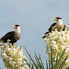 "Caracaras on Flowering Yucca © 2009 Nova Mackentley Laguna Atascosa NWR, TX CA2  <div class=""ss-paypal-button""><div class=""ss-paypal-add-to-cart-section""><div class=""ss-paypal-product-options""><h4>Mat Sizes</h4><ul><li><a href=""https://www.paypal.com/cgi-bin/webscr?cmd=_cart&amp;business=T77V5VKCW4K2U&amp;lc=US&amp;item_name=Caracaras%20on%20Flowering%20Yucca%20%C2%A9%202009%20Nova%20Mackentley%20Laguna%20Atascosa%20NWR%2C%20TX%20CA2&amp;item_number=http%3A%2F%2Fwww.nightflightimages.com%2FGalleries-1%2FHawks%2Fi-mzBzXz2&amp;button_subtype=products&amp;no_note=0&amp;cn=Add%20special%20instructions%20to%20the%20seller%3A&amp;no_shipping=2&amp;currency_code=USD&amp;weight_unit=lbs&amp;add=1&amp;bn=PP-ShopCartBF%3Abtn_cart_SM.gif%3ANonHosted&amp;on0=Mat%20Sizes&amp;option_select0=5%20x%207&amp;option_amount0=10.00&amp;option_select1=8%20x%2010&amp;option_amount1=18.00&amp;option_select2=11%20x%2014&amp;option_amount2=28.00&amp;option_select3=card&amp;option_amount3=4.00&amp;option_index=0&amp;charset=utf-8&amp;submit=&amp;os0=5%20x%207"" target=""paypal""><span>5 x 7 $11.00 USD</span><img src=""https://www.paypalobjects.com/en_US/i/btn/btn_cart_SM.gif""></a></li><li><a href=""https://www.paypal.com/cgi-bin/webscr?cmd=_cart&amp;business=T77V5VKCW4K2U&amp;lc=US&amp;item_name=Caracaras%20on%20Flowering%20Yucca%20%C2%A9%202009%20Nova%20Mackentley%20Laguna%20Atascosa%20NWR%2C%20TX%20CA2&amp;item_number=http%3A%2F%2Fwww.nightflightimages.com%2FGalleries-1%2FHawks%2Fi-mzBzXz2&amp;button_subtype=products&amp;no_note=0&amp;cn=Add%20special%20instructions%20to%20the%20seller%3A&amp;no_shipping=2&amp;currency_code=USD&amp;weight_unit=lbs&amp;add=1&amp;bn=PP-ShopCartBF%3Abtn_cart_SM.gif%3ANonHosted&amp;on0=Mat%20Sizes&amp;option_select0=5%20x%207&amp;option_amount0=10.00&amp;option_select1=8%20x%2010&amp;option_amount1=18.00&amp;option_select2=11%20x%2014&amp;option_amount2=28.00&amp;option_select3=card&amp;option_amount3=4.00&amp;option_index=0&amp;charset=utf-8&amp;submit=&amp;os0=8%20x%2010"" target=""paypal""><span>8 x 10 $19.00 USD</span><img src=""https://www.paypalobjects.com/en_US/i/btn/btn_cart_SM.gif""></a></li><li><a href=""https://www.paypal.com/cgi-bin/webscr?cmd=_cart&amp;business=T77V5VKCW4K2U&amp;lc=US&amp;item_name=Caracaras%20on%20Flowering%20Yucca%20%C2%A9%202009%20Nova%20Mackentley%20Laguna%20Atascosa%20NWR%2C%20TX%20CA2&amp;item_number=http%3A%2F%2Fwww.nightflightimages.com%2FGalleries-1%2FHawks%2Fi-mzBzXz2&amp;button_subtype=products&amp;no_note=0&amp;cn=Add%20special%20instructions%20to%20the%20seller%3A&amp;no_shipping=2&amp;currency_code=USD&amp;weight_unit=lbs&amp;add=1&amp;bn=PP-ShopCartBF%3Abtn_cart_SM.gif%3ANonHosted&amp;on0=Mat%20Sizes&amp;option_select0=5%20x%207&amp;option_amount0=10.00&amp;option_select1=8%20x%2010&amp;option_amount1=18.00&amp;option_select2=11%20x%2014&amp;option_amount2=28.00&amp;option_select3=card&amp;option_amount3=4.00&amp;option_index=0&amp;charset=utf-8&amp;submit=&amp;os0=11%20x%2014"" target=""paypal""><span>11 x 14 $29.00 USD</span><img src=""https://www.paypalobjects.com/en_US/i/btn/btn_cart_SM.gif""></a></li><li><a href=""https://www.paypal.com/cgi-bin/webscr?cmd=_cart&amp;business=T77V5VKCW4K2U&amp;lc=US&amp;item_name=Caracaras%20on%20Flowering%20Yucca%20%C2%A9%202009%20Nova%20Mackentley%20Laguna%20Atascosa%20NWR%2C%20TX%20CA2&amp;item_number=http%3A%2F%2Fwww.nightflightimages.com%2FGalleries-1%2FHawks%2Fi-mzBzXz2&amp;button_subtype=products&amp;no_note=0&amp;cn=Add%20special%20instructions%20to%20the%20seller%3A&amp;no_shipping=2&amp;currency_code=USD&amp;weight_unit=lbs&amp;add=1&amp;bn=PP-ShopCartBF%3Abtn_cart_SM.gif%3ANonHosted&amp;on0=Mat%20Sizes&amp;option_select0=5%20x%207&amp;option_amount0=10.00&amp;option_select1=8%20x%2010&amp;option_amount1=18.00&amp;option_select2=11%20x%2014&amp;option_amount2=28.00&amp;option_select3=card&amp;option_amount3=4.00&amp;option_index=0&amp;charset=utf-8&amp;submit=&amp;os0=card"" target=""paypal""><span>card $5.00 USD</span><img src=""https://www.paypalobjects.com/en_US/i/btn/btn_cart_SM.gif""></a></li></ul></div></div> <div class=""ss-paypal-view-cart-section""><a href=""https://www.paypal.com/cgi-bin/webscr?cmd=_cart&amp;business=T77V5VKCW4K2U&amp;display=1&amp;item_name=Caracaras%20on%20Flowering%20Yucca%20%C2%A9%202009%20Nova%20Mackentley%20Laguna%20Atascosa%20NWR%2C%20TX%20CA2&amp;item_number=http%3A%2F%2Fwww.nightflightimages.com%2FGalleries-1%2FHawks%2Fi-mzBzXz2&amp;charset=utf-8&amp;submit="" target=""paypal"" class=""ss-paypal-submit-button""><img src=""https://www.paypalobjects.com/en_US/i/btn/btn_viewcart_LG.gif""></a></div></div><div class=""ss-paypal-button-end""></div>"