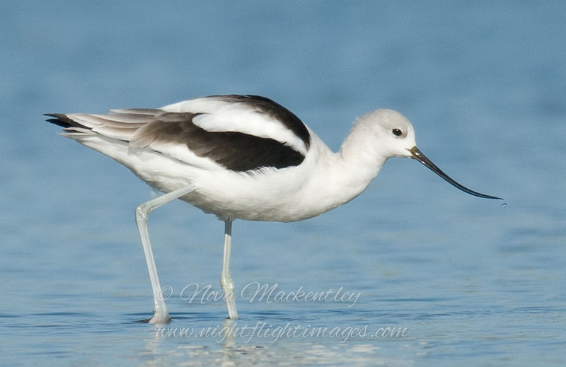 "American Avocet © 2008 Nova Mackentley Laguna Atascosa NWR, TX AVO  <div class=""ss-paypal-button""><div class=""ss-paypal-add-to-cart-section""><div class=""ss-paypal-product-options""><h4>Mat Sizes</h4><ul><li><a href=""https://www.paypal.com/cgi-bin/webscr?cmd=_cart&business=T77V5VKCW4K2U&lc=US&item_name=American%20Avocet%20%C2%A9%202008%20Nova%20Mackentley%20Laguna%20Atascosa%20NWR%2C%20TX%20AVO&item_number=http%3A%2F%2Fwww.nightflightimages.com%2FGalleries-1%2FShore%2Fi-pdJs9HQ&button_subtype=products&no_note=0&cn=Add%20special%20instructions%20to%20the%20seller%3A&no_shipping=2&currency_code=USD&weight_unit=lbs&add=1&bn=PP-ShopCartBF%3Abtn_cart_SM.gif%3ANonHosted&on0=Mat%20Sizes&option_select0=5%20x%207&option_amount0=10.00&option_select1=8%20x%2010&option_amount1=18.00&option_select2=11%20x%2014&option_amount2=28.00&option_select3=card&option_amount3=4.00&option_index=0&charset=utf-8&submit=&os0=5%20x%207"" target=""paypal""><span>5 x 7 $11.00 USD</span><img src=""https://www.paypalobjects.com/en_US/i/btn/btn_cart_SM.gif""></a></li><li><a href=""https://www.paypal.com/cgi-bin/webscr?cmd=_cart&business=T77V5VKCW4K2U&lc=US&item_name=American%20Avocet%20%C2%A9%202008%20Nova%20Mackentley%20Laguna%20Atascosa%20NWR%2C%20TX%20AVO&item_number=http%3A%2F%2Fwww.nightflightimages.com%2FGalleries-1%2FShore%2Fi-pdJs9HQ&button_subtype=products&no_note=0&cn=Add%20special%20instructions%20to%20the%20seller%3A&no_shipping=2&currency_code=USD&weight_unit=lbs&add=1&bn=PP-ShopCartBF%3Abtn_cart_SM.gif%3ANonHosted&on0=Mat%20Sizes&option_select0=5%20x%207&option_amount0=10.00&option_select1=8%20x%2010&option_amount1=18.00&option_select2=11%20x%2014&option_amount2=28.00&option_select3=card&option_amount3=4.00&option_index=0&charset=utf-8&submit=&os0=8%20x%2010"" target=""paypal""><span>8 x 10 $19.00 USD</span><img src=""https://www.paypalobjects.com/en_US/i/btn/btn_cart_SM.gif""></a></li><li><a href=""https://www.paypal.com/cgi-bin/webscr?cmd=_cart&business=T77V5VKCW4K2U&lc=US&item_name=American%20Avocet%20%C2%A9%202008%20Nova%20Mackentley%20Laguna%20Atascosa%20NWR%2C%20TX%20AVO&item_number=http%3A%2F%2Fwww.nightflightimages.com%2FGalleries-1%2FShore%2Fi-pdJs9HQ&button_subtype=products&no_note=0&cn=Add%20special%20instructions%20to%20the%20seller%3A&no_shipping=2&currency_code=USD&weight_unit=lbs&add=1&bn=PP-ShopCartBF%3Abtn_cart_SM.gif%3ANonHosted&on0=Mat%20Sizes&option_select0=5%20x%207&option_amount0=10.00&option_select1=8%20x%2010&option_amount1=18.00&option_select2=11%20x%2014&option_amount2=28.00&option_select3=card&option_amount3=4.00&option_index=0&charset=utf-8&submit=&os0=11%20x%2014"" target=""paypal""><span>11 x 14 $29.00 USD</span><img src=""https://www.paypalobjects.com/en_US/i/btn/btn_cart_SM.gif""></a></li><li><a href=""https://www.paypal.com/cgi-bin/webscr?cmd=_cart&business=T77V5VKCW4K2U&lc=US&item_name=American%20Avocet%20%C2%A9%202008%20Nova%20Mackentley%20Laguna%20Atascosa%20NWR%2C%20TX%20AVO&item_number=http%3A%2F%2Fwww.nightflightimages.com%2FGalleries-1%2FShore%2Fi-pdJs9HQ&button_subtype=products&no_note=0&cn=Add%20special%20instructions%20to%20the%20seller%3A&no_shipping=2&currency_code=USD&weight_unit=lbs&add=1&bn=PP-ShopCartBF%3Abtn_cart_SM.gif%3ANonHosted&on0=Mat%20Sizes&option_select0=5%20x%207&option_amount0=10.00&option_select1=8%20x%2010&option_amount1=18.00&option_select2=11%20x%2014&option_amount2=28.00&option_select3=card&option_amount3=4.00&option_index=0&charset=utf-8&submit=&os0=card"" target=""paypal""><span>card $5.00 USD</span><img src=""https://www.paypalobjects.com/en_US/i/btn/btn_cart_SM.gif""></a></li></ul></div></div> <div class=""ss-paypal-view-cart-section""><a href=""https://www.paypal.com/cgi-bin/webscr?cmd=_cart&business=T77V5VKCW4K2U&display=1&item_name=American%20Avocet%20%C2%A9%202008%20Nova%20Mackentley%20Laguna%20Atascosa%20NWR%2C%20TX%20AVO&item_number=http%3A%2F%2Fwww.nightflightimages.com%2FGalleries-1%2FShore%2Fi-pdJs9HQ&charset=utf-8&submit="" target=""paypal"" class=""ss-paypal-submit-button""><img src=""https://www.paypalobjects.com/en_US/i/btn/btn_viewcart_LG.gif""></a></div></div><div class=""ss-paypal-button-end""></div>"