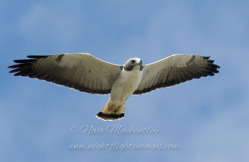 """White-tailed Hawk © 2009 Nova Mackentley Laguna Atascosa NWR, TX WTH  <div class=""""ss-paypal-button""""><div class=""""ss-paypal-add-to-cart-section""""><div class=""""ss-paypal-product-options""""><h4>Mat Sizes</h4><ul><li><a href=""""https://www.paypal.com/cgi-bin/webscr?cmd=_cart&amp;business=T77V5VKCW4K2U&amp;lc=US&amp;item_name=White-tailed%20Hawk%20%C2%A9%202009%20Nova%20Mackentley%20Laguna%20Atascosa%20NWR%2C%20TX%20WTH&amp;item_number=http%3A%2F%2Fwww.nightflightimages.com%2FGalleries-1%2FHawks%2Fi-pjw9t8z&amp;button_subtype=products&amp;no_note=0&amp;cn=Add%20special%20instructions%20to%20the%20seller%3A&amp;no_shipping=2&amp;currency_code=USD&amp;weight_unit=lbs&amp;add=1&amp;bn=PP-ShopCartBF%3Abtn_cart_SM.gif%3ANonHosted&amp;on0=Mat%20Sizes&amp;option_select0=5%20x%207&amp;option_amount0=10.00&amp;option_select1=8%20x%2010&amp;option_amount1=18.00&amp;option_select2=11%20x%2014&amp;option_amount2=28.00&amp;option_select3=card&amp;option_amount3=4.00&amp;option_index=0&amp;charset=utf-8&amp;submit=&amp;os0=5%20x%207"""" target=""""paypal""""><span>5 x 7 $11.00 USD</span><img src=""""https://www.paypalobjects.com/en_US/i/btn/btn_cart_SM.gif""""></a></li><li><a href=""""https://www.paypal.com/cgi-bin/webscr?cmd=_cart&amp;business=T77V5VKCW4K2U&amp;lc=US&amp;item_name=White-tailed%20Hawk%20%C2%A9%202009%20Nova%20Mackentley%20Laguna%20Atascosa%20NWR%2C%20TX%20WTH&amp;item_number=http%3A%2F%2Fwww.nightflightimages.com%2FGalleries-1%2FHawks%2Fi-pjw9t8z&amp;button_subtype=products&amp;no_note=0&amp;cn=Add%20special%20instructions%20to%20the%20seller%3A&amp;no_shipping=2&amp;currency_code=USD&amp;weight_unit=lbs&amp;add=1&amp;bn=PP-ShopCartBF%3Abtn_cart_SM.gif%3ANonHosted&amp;on0=Mat%20Sizes&amp;option_select0=5%20x%207&amp;option_amount0=10.00&amp;option_select1=8%20x%2010&amp;option_amount1=18.00&amp;option_select2=11%20x%2014&amp;option_amount2=28.00&amp;option_select3=card&amp;option_amount3=4.00&amp;option_index=0&amp;charset=utf-8&amp;submit=&amp;os0=8%20x%2010"""" target=""""paypal""""><span>8 x 10 $19"""
