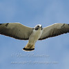 "White-tailed Hawk © 2009 Nova Mackentley Laguna Atascosa NWR, TX WTH  <div class=""ss-paypal-button""><div class=""ss-paypal-add-to-cart-section""><div class=""ss-paypal-product-options""><h4>Mat Sizes</h4><ul><li><a href=""https://www.paypal.com/cgi-bin/webscr?cmd=_cart&business=T77V5VKCW4K2U&lc=US&item_name=White-tailed%20Hawk%20%C2%A9%202009%20Nova%20Mackentley%20Laguna%20Atascosa%20NWR%2C%20TX%20WTH&item_number=http%3A%2F%2Fwww.nightflightimages.com%2FGalleries-1%2FHawks%2Fi-pjw9t8z&button_subtype=products&no_note=0&cn=Add%20special%20instructions%20to%20the%20seller%3A&no_shipping=2&currency_code=USD&weight_unit=lbs&add=1&bn=PP-ShopCartBF%3Abtn_cart_SM.gif%3ANonHosted&on0=Mat%20Sizes&option_select0=5%20x%207&option_amount0=10.00&option_select1=8%20x%2010&option_amount1=18.00&option_select2=11%20x%2014&option_amount2=28.00&option_select3=card&option_amount3=4.00&option_index=0&charset=utf-8&submit=&os0=5%20x%207"" target=""paypal""><span>5 x 7 $11.00 USD</span><img src=""https://www.paypalobjects.com/en_US/i/btn/btn_cart_SM.gif""></a></li><li><a href=""https://www.paypal.com/cgi-bin/webscr?cmd=_cart&business=T77V5VKCW4K2U&lc=US&item_name=White-tailed%20Hawk%20%C2%A9%202009%20Nova%20Mackentley%20Laguna%20Atascosa%20NWR%2C%20TX%20WTH&item_number=http%3A%2F%2Fwww.nightflightimages.com%2FGalleries-1%2FHawks%2Fi-pjw9t8z&button_subtype=products&no_note=0&cn=Add%20special%20instructions%20to%20the%20seller%3A&no_shipping=2&currency_code=USD&weight_unit=lbs&add=1&bn=PP-ShopCartBF%3Abtn_cart_SM.gif%3ANonHosted&on0=Mat%20Sizes&option_select0=5%20x%207&option_amount0=10.00&option_select1=8%20x%2010&option_amount1=18.00&option_select2=11%20x%2014&option_amount2=28.00&option_select3=card&option_amount3=4.00&option_index=0&charset=utf-8&submit=&os0=8%20x%2010"" target=""paypal""><span>8 x 10 $19.00 USD</span><img src=""https://www.paypalobjects.com/en_US/i/btn/btn_cart_SM.gif""></a></li><li><a href=""https://www.paypal.com/cgi-bin/webscr?cmd=_cart&business=T77V5VKCW4K2U&lc=US&item_name=White-tailed%20Hawk%20%C2%A9%202009%20Nova%20Mackentley%20Laguna%20Atascosa%20NWR%2C%20TX%20WTH&item_number=http%3A%2F%2Fwww.nightflightimages.com%2FGalleries-1%2FHawks%2Fi-pjw9t8z&button_subtype=products&no_note=0&cn=Add%20special%20instructions%20to%20the%20seller%3A&no_shipping=2&currency_code=USD&weight_unit=lbs&add=1&bn=PP-ShopCartBF%3Abtn_cart_SM.gif%3ANonHosted&on0=Mat%20Sizes&option_select0=5%20x%207&option_amount0=10.00&option_select1=8%20x%2010&option_amount1=18.00&option_select2=11%20x%2014&option_amount2=28.00&option_select3=card&option_amount3=4.00&option_index=0&charset=utf-8&submit=&os0=11%20x%2014"" target=""paypal""><span>11 x 14 $29.00 USD</span><img src=""https://www.paypalobjects.com/en_US/i/btn/btn_cart_SM.gif""></a></li><li><a href=""https://www.paypal.com/cgi-bin/webscr?cmd=_cart&business=T77V5VKCW4K2U&lc=US&item_name=White-tailed%20Hawk%20%C2%A9%202009%20Nova%20Mackentley%20Laguna%20Atascosa%20NWR%2C%20TX%20WTH&item_number=http%3A%2F%2Fwww.nightflightimages.com%2FGalleries-1%2FHawks%2Fi-pjw9t8z&button_subtype=products&no_note=0&cn=Add%20special%20instructions%20to%20the%20seller%3A&no_shipping=2&currency_code=USD&weight_unit=lbs&add=1&bn=PP-ShopCartBF%3Abtn_cart_SM.gif%3ANonHosted&on0=Mat%20Sizes&option_select0=5%20x%207&option_amount0=10.00&option_select1=8%20x%2010&option_amount1=18.00&option_select2=11%20x%2014&option_amount2=28.00&option_select3=card&option_amount3=4.00&option_index=0&charset=utf-8&submit=&os0=card"" target=""paypal""><span>card $5.00 USD</span><img src=""https://www.paypalobjects.com/en_US/i/btn/btn_cart_SM.gif""></a></li></ul></div></div> <div class=""ss-paypal-view-cart-section""><a href=""https://www.paypal.com/cgi-bin/webscr?cmd=_cart&business=T77V5VKCW4K2U&display=1&item_name=White-tailed%20Hawk%20%C2%A9%202009%20Nova%20Mackentley%20Laguna%20Atascosa%20NWR%2C%20TX%20WTH&item_number=http%3A%2F%2Fwww.nightflightimages.com%2FGalleries-1%2FHawks%2Fi-pjw9t8z&charset=utf-8&submit="" target=""paypal"" class=""ss-paypal-submit-button""><img src=""https://www.paypalobjects.com/en_US/i/btn/btn_viewcart_LG.gif""></a></div></div><div class=""ss-paypal-button-end""></div>"