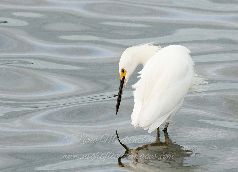 "Snowy Egret © 2007 Nova Mackentley Laguna Atascosa NWR, TX SNS  <div class=""ss-paypal-button""><div class=""ss-paypal-add-to-cart-section""><div class=""ss-paypal-product-options""><h4>Mat Sizes</h4><ul><li><a href=""https://www.paypal.com/cgi-bin/webscr?cmd=_cart&amp;business=T77V5VKCW4K2U&amp;lc=US&amp;item_name=Snowy%20Egret%20%C2%A9%202007%20Nova%20Mackentley%20Laguna%20Atascosa%20NWR%2C%20TX%20SNS&amp;item_number=http%3A%2F%2Fwww.nightflightimages.com%2FGalleries-1%2FOur-Favorites%2Fi-pnqpDtz&amp;button_subtype=products&amp;no_note=0&amp;cn=Add%20special%20instructions%20to%20the%20seller%3A&amp;no_shipping=2&amp;currency_code=USD&amp;weight_unit=lbs&amp;add=1&amp;bn=PP-ShopCartBF%3Abtn_cart_SM.gif%3ANonHosted&amp;on0=Mat%20Sizes&amp;option_select0=5%20x%207&amp;option_amount0=10.00&amp;option_select1=8%20x%2010&amp;option_amount1=18.00&amp;option_select2=11%20x%2014&amp;option_amount2=28.00&amp;option_select3=card&amp;option_amount3=4.00&amp;option_index=0&amp;charset=utf-8&amp;submit=&amp;os0=5%20x%207"" target=""paypal""><span>5 x 7 $11.00 USD</span><img src=""https://www.paypalobjects.com/en_US/i/btn/btn_cart_SM.gif""></a></li><li><a href=""https://www.paypal.com/cgi-bin/webscr?cmd=_cart&amp;business=T77V5VKCW4K2U&amp;lc=US&amp;item_name=Snowy%20Egret%20%C2%A9%202007%20Nova%20Mackentley%20Laguna%20Atascosa%20NWR%2C%20TX%20SNS&amp;item_number=http%3A%2F%2Fwww.nightflightimages.com%2FGalleries-1%2FOur-Favorites%2Fi-pnqpDtz&amp;button_subtype=products&amp;no_note=0&amp;cn=Add%20special%20instructions%20to%20the%20seller%3A&amp;no_shipping=2&amp;currency_code=USD&amp;weight_unit=lbs&amp;add=1&amp;bn=PP-ShopCartBF%3Abtn_cart_SM.gif%3ANonHosted&amp;on0=Mat%20Sizes&amp;option_select0=5%20x%207&amp;option_amount0=10.00&amp;option_select1=8%20x%2010&amp;option_amount1=18.00&amp;option_select2=11%20x%2014&amp;option_amount2=28.00&amp;option_select3=card&amp;option_amount3=4.00&amp;option_index=0&amp;charset=utf-8&amp;submit=&amp;os0=8%20x%2010"" target=""paypal""><span>8 x 10 $19.00 USD</span><img src=""https://www.paypalobjects.com/en_US/i/btn/btn_cart_SM.gif""></a></li><li><a href=""https://www.paypal.com/cgi-bin/webscr?cmd=_cart&amp;business=T77V5VKCW4K2U&amp;lc=US&amp;item_name=Snowy%20Egret%20%C2%A9%202007%20Nova%20Mackentley%20Laguna%20Atascosa%20NWR%2C%20TX%20SNS&amp;item_number=http%3A%2F%2Fwww.nightflightimages.com%2FGalleries-1%2FOur-Favorites%2Fi-pnqpDtz&amp;button_subtype=products&amp;no_note=0&amp;cn=Add%20special%20instructions%20to%20the%20seller%3A&amp;no_shipping=2&amp;currency_code=USD&amp;weight_unit=lbs&amp;add=1&amp;bn=PP-ShopCartBF%3Abtn_cart_SM.gif%3ANonHosted&amp;on0=Mat%20Sizes&amp;option_select0=5%20x%207&amp;option_amount0=10.00&amp;option_select1=8%20x%2010&amp;option_amount1=18.00&amp;option_select2=11%20x%2014&amp;option_amount2=28.00&amp;option_select3=card&amp;option_amount3=4.00&amp;option_index=0&amp;charset=utf-8&amp;submit=&amp;os0=11%20x%2014"" target=""paypal""><span>11 x 14 $29.00 USD</span><img src=""https://www.paypalobjects.com/en_US/i/btn/btn_cart_SM.gif""></a></li><li><a href=""https://www.paypal.com/cgi-bin/webscr?cmd=_cart&amp;business=T77V5VKCW4K2U&amp;lc=US&amp;item_name=Snowy%20Egret%20%C2%A9%202007%20Nova%20Mackentley%20Laguna%20Atascosa%20NWR%2C%20TX%20SNS&amp;item_number=http%3A%2F%2Fwww.nightflightimages.com%2FGalleries-1%2FOur-Favorites%2Fi-pnqpDtz&amp;button_subtype=products&amp;no_note=0&amp;cn=Add%20special%20instructions%20to%20the%20seller%3A&amp;no_shipping=2&amp;currency_code=USD&amp;weight_unit=lbs&amp;add=1&amp;bn=PP-ShopCartBF%3Abtn_cart_SM.gif%3ANonHosted&amp;on0=Mat%20Sizes&amp;option_select0=5%20x%207&amp;option_amount0=10.00&amp;option_select1=8%20x%2010&amp;option_amount1=18.00&amp;option_select2=11%20x%2014&amp;option_amount2=28.00&amp;option_select3=card&amp;option_amount3=4.00&amp;option_index=0&amp;charset=utf-8&amp;submit=&amp;os0=card"" target=""paypal""><span>card $5.00 USD</span><img src=""https://www.paypalobjects.com/en_US/i/btn/btn_cart_SM.gif""></a></li></ul></div></div> <div class=""ss-paypal-view-cart-section""><a href=""https://www.paypal.com/cgi-bin/webscr?cmd=_cart&amp;business=T77V5VKCW4K2U&amp;display=1&amp;item_name=Snowy%20Egret%20%C2%A9%202007%20Nova%20Mackentley%20Laguna%20Atascosa%20NWR%2C%20TX%20SNS&amp;item_number=http%3A%2F%2Fwww.nightflightimages.com%2FGalleries-1%2FOur-Favorites%2Fi-pnqpDtz&amp;charset=utf-8&amp;submit="" target=""paypal"" class=""ss-paypal-submit-button""><img src=""https://www.paypalobjects.com/en_US/i/btn/btn_viewcart_LG.gif""></a></div></div><div class=""ss-paypal-button-end""></div>"