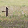 "Aplomodo Falcon © 2009 C. M. Neri.  Laguna Atascosa NWR, TX APFAHYFL2  <div class=""ss-paypal-button""><div class=""ss-paypal-add-to-cart-section""><div class=""ss-paypal-product-options""><h4>Mat Sizes</h4><ul><li><a href=""https://www.paypal.com/cgi-bin/webscr?cmd=_cart&business=T77V5VKCW4K2U&lc=US&item_name=Aplomodo%20Falcon%20%C2%A9%202009%20C.%20M.%20Neri.%20%20Laguna%20Atascosa%20NWR%2C%20TX%20APFAHYFL2&item_number=http%3A%2F%2Fwww.nightflightimages.com%2FGalleries-1%2FHawks%2Fi-qWStsGL&button_subtype=products&no_note=0&cn=Add%20special%20instructions%20to%20the%20seller%3A&no_shipping=2&currency_code=USD&weight_unit=lbs&add=1&bn=PP-ShopCartBF%3Abtn_cart_SM.gif%3ANonHosted&on0=Mat%20Sizes&option_select0=5%20x%207&option_amount0=10.00&option_select1=8%20x%2010&option_amount1=18.00&option_select2=11%20x%2014&option_amount2=28.00&option_select3=card&option_amount3=4.00&option_index=0&charset=utf-8&submit=&os0=5%20x%207"" target=""paypal""><span>5 x 7 $11.00 USD</span><img src=""https://www.paypalobjects.com/en_US/i/btn/btn_cart_SM.gif""></a></li><li><a href=""https://www.paypal.com/cgi-bin/webscr?cmd=_cart&business=T77V5VKCW4K2U&lc=US&item_name=Aplomodo%20Falcon%20%C2%A9%202009%20C.%20M.%20Neri.%20%20Laguna%20Atascosa%20NWR%2C%20TX%20APFAHYFL2&item_number=http%3A%2F%2Fwww.nightflightimages.com%2FGalleries-1%2FHawks%2Fi-qWStsGL&button_subtype=products&no_note=0&cn=Add%20special%20instructions%20to%20the%20seller%3A&no_shipping=2&currency_code=USD&weight_unit=lbs&add=1&bn=PP-ShopCartBF%3Abtn_cart_SM.gif%3ANonHosted&on0=Mat%20Sizes&option_select0=5%20x%207&option_amount0=10.00&option_select1=8%20x%2010&option_amount1=18.00&option_select2=11%20x%2014&option_amount2=28.00&option_select3=card&option_amount3=4.00&option_index=0&charset=utf-8&submit=&os0=8%20x%2010"" target=""paypal""><span>8 x 10 $19.00 USD</span><img src=""https://www.paypalobjects.com/en_US/i/btn/btn_cart_SM.gif""></a></li><li><a href=""https://www.paypal.com/cgi-bin/webscr?cmd=_cart&business=T77V5VKCW4K2U&lc=US&item_name=Aplomodo%20Falcon%20%C2%A9%202009%20C.%20M.%20Neri.%20%20Laguna%20Atascosa%20NWR%2C%20TX%20APFAHYFL2&item_number=http%3A%2F%2Fwww.nightflightimages.com%2FGalleries-1%2FHawks%2Fi-qWStsGL&button_subtype=products&no_note=0&cn=Add%20special%20instructions%20to%20the%20seller%3A&no_shipping=2&currency_code=USD&weight_unit=lbs&add=1&bn=PP-ShopCartBF%3Abtn_cart_SM.gif%3ANonHosted&on0=Mat%20Sizes&option_select0=5%20x%207&option_amount0=10.00&option_select1=8%20x%2010&option_amount1=18.00&option_select2=11%20x%2014&option_amount2=28.00&option_select3=card&option_amount3=4.00&option_index=0&charset=utf-8&submit=&os0=11%20x%2014"" target=""paypal""><span>11 x 14 $29.00 USD</span><img src=""https://www.paypalobjects.com/en_US/i/btn/btn_cart_SM.gif""></a></li><li><a href=""https://www.paypal.com/cgi-bin/webscr?cmd=_cart&business=T77V5VKCW4K2U&lc=US&item_name=Aplomodo%20Falcon%20%C2%A9%202009%20C.%20M.%20Neri.%20%20Laguna%20Atascosa%20NWR%2C%20TX%20APFAHYFL2&item_number=http%3A%2F%2Fwww.nightflightimages.com%2FGalleries-1%2FHawks%2Fi-qWStsGL&button_subtype=products&no_note=0&cn=Add%20special%20instructions%20to%20the%20seller%3A&no_shipping=2&currency_code=USD&weight_unit=lbs&add=1&bn=PP-ShopCartBF%3Abtn_cart_SM.gif%3ANonHosted&on0=Mat%20Sizes&option_select0=5%20x%207&option_amount0=10.00&option_select1=8%20x%2010&option_amount1=18.00&option_select2=11%20x%2014&option_amount2=28.00&option_select3=card&option_amount3=4.00&option_index=0&charset=utf-8&submit=&os0=card"" target=""paypal""><span>card $5.00 USD</span><img src=""https://www.paypalobjects.com/en_US/i/btn/btn_cart_SM.gif""></a></li></ul></div></div> <div class=""ss-paypal-view-cart-section""><a href=""https://www.paypal.com/cgi-bin/webscr?cmd=_cart&business=T77V5VKCW4K2U&display=1&item_name=Aplomodo%20Falcon%20%C2%A9%202009%20C.%20M.%20Neri.%20%20Laguna%20Atascosa%20NWR%2C%20TX%20APFAHYFL2&item_number=http%3A%2F%2Fwww.nightflightimages.com%2FGalleries-1%2FHawks%2Fi-qWStsGL&charset=utf-8&submit="" target=""paypal"" class=""ss-paypal-submit-button""><img src=""https://www.paypalobjects.com/en_US/i/btn/btn_viewcart_LG.gif""></a></div></div><div class=""ss-paypal-button-end""></div>"
