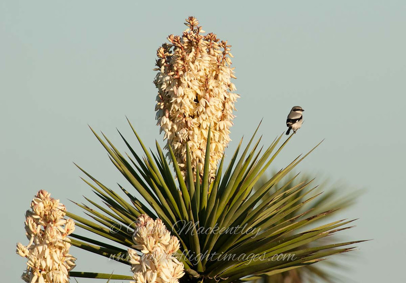 "Loggerhead Shrike on Flowering Yucca © 2010 Nova Mackentley Laguna Atascosa NWR, TX SRY  <div class=""ss-paypal-button""><div class=""ss-paypal-add-to-cart-section""><div class=""ss-paypal-product-options""><h4>Mat Sizes</h4><ul><li><a href=""https://www.paypal.com/cgi-bin/webscr?cmd=_cart&business=T77V5VKCW4K2U&lc=US&item_name=Loggerhead%20Shrike%20on%20Flowering%20Yucca%20%C2%A9%202010%20Nova%20Mackentley%20Laguna%20Atascosa%20NWR%2C%20TX%20SRY&item_number=http%3A%2F%2Fwww.nightflightimages.com%2FGalleries-1%2FOur-Favorites%2Fi-qZvmvh3&button_subtype=products&no_note=0&cn=Add%20special%20instructions%20to%20the%20seller%3A&no_shipping=2&currency_code=USD&weight_unit=lbs&add=1&bn=PP-ShopCartBF%3Abtn_cart_SM.gif%3ANonHosted&on0=Mat%20Sizes&option_select0=5%20x%207&option_amount0=10.00&option_select1=8%20x%2010&option_amount1=18.00&option_select2=11%20x%2014&option_amount2=28.00&option_select3=card&option_amount3=4.00&option_index=0&charset=utf-8&submit=&os0=5%20x%207"" target=""paypal""><span>5 x 7 $11.00 USD</span><img src=""https://www.paypalobjects.com/en_US/i/btn/btn_cart_SM.gif""></a></li><li><a href=""https://www.paypal.com/cgi-bin/webscr?cmd=_cart&business=T77V5VKCW4K2U&lc=US&item_name=Loggerhead%20Shrike%20on%20Flowering%20Yucca%20%C2%A9%202010%20Nova%20Mackentley%20Laguna%20Atascosa%20NWR%2C%20TX%20SRY&item_number=http%3A%2F%2Fwww.nightflightimages.com%2FGalleries-1%2FOur-Favorites%2Fi-qZvmvh3&button_subtype=products&no_note=0&cn=Add%20special%20instructions%20to%20the%20seller%3A&no_shipping=2&currency_code=USD&weight_unit=lbs&add=1&bn=PP-ShopCartBF%3Abtn_cart_SM.gif%3ANonHosted&on0=Mat%20Sizes&option_select0=5%20x%207&option_amount0=10.00&option_select1=8%20x%2010&option_amount1=18.00&option_select2=11%20x%2014&option_amount2=28.00&option_select3=card&option_amount3=4.00&option_index=0&charset=utf-8&submit=&os0=8%20x%2010"" target=""paypal""><span>8 x 10 $19.00 USD</span><img src=""https://www.paypalobjects.com/en_US/i/btn/btn_cart_SM.gif""></a></li><li><a href=""https://www.paypal.com/cgi-bin/webscr?cmd=_cart&business=T77V5VKCW4K2U&lc=US&item_name=Loggerhead%20Shrike%20on%20Flowering%20Yucca%20%C2%A9%202010%20Nova%20Mackentley%20Laguna%20Atascosa%20NWR%2C%20TX%20SRY&item_number=http%3A%2F%2Fwww.nightflightimages.com%2FGalleries-1%2FOur-Favorites%2Fi-qZvmvh3&button_subtype=products&no_note=0&cn=Add%20special%20instructions%20to%20the%20seller%3A&no_shipping=2&currency_code=USD&weight_unit=lbs&add=1&bn=PP-ShopCartBF%3Abtn_cart_SM.gif%3ANonHosted&on0=Mat%20Sizes&option_select0=5%20x%207&option_amount0=10.00&option_select1=8%20x%2010&option_amount1=18.00&option_select2=11%20x%2014&option_amount2=28.00&option_select3=card&option_amount3=4.00&option_index=0&charset=utf-8&submit=&os0=11%20x%2014"" target=""paypal""><span>11 x 14 $29.00 USD</span><img src=""https://www.paypalobjects.com/en_US/i/btn/btn_cart_SM.gif""></a></li><li><a href=""https://www.paypal.com/cgi-bin/webscr?cmd=_cart&business=T77V5VKCW4K2U&lc=US&item_name=Loggerhead%20Shrike%20on%20Flowering%20Yucca%20%C2%A9%202010%20Nova%20Mackentley%20Laguna%20Atascosa%20NWR%2C%20TX%20SRY&item_number=http%3A%2F%2Fwww.nightflightimages.com%2FGalleries-1%2FOur-Favorites%2Fi-qZvmvh3&button_subtype=products&no_note=0&cn=Add%20special%20instructions%20to%20the%20seller%3A&no_shipping=2&currency_code=USD&weight_unit=lbs&add=1&bn=PP-ShopCartBF%3Abtn_cart_SM.gif%3ANonHosted&on0=Mat%20Sizes&option_select0=5%20x%207&option_amount0=10.00&option_select1=8%20x%2010&option_amount1=18.00&option_select2=11%20x%2014&option_amount2=28.00&option_select3=card&option_amount3=4.00&option_index=0&charset=utf-8&submit=&os0=card"" target=""paypal""><span>card $5.00 USD</span><img src=""https://www.paypalobjects.com/en_US/i/btn/btn_cart_SM.gif""></a></li></ul></div></div> <div class=""ss-paypal-view-cart-section""><a href=""https://www.paypal.com/cgi-bin/webscr?cmd=_cart&business=T77V5VKCW4K2U&display=1&item_name=Loggerhead%20Shrike%20on%20Flowering%20Yucca%20%C2%A9%202010%20Nova%20Mackentley%20Laguna%20Atascosa%20NWR%2C%20TX%20SRY&item_number=http%3A%2F%2Fwww.nightflightimages.com%2FGalleries-1%2FOur-Favorites%2Fi-qZvmvh3&charset=utf-8&submit="" target=""paypal"" class=""ss-paypal-submit-button""><img src=""https://www.paypalobjects.com/en_US/i/btn/btn_viewcart_LG.gif""></a></div></div><div class=""ss-paypal-button-end""></div>"