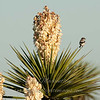 "Loggerhead Shrike on Flowering Yucca © 2010 Nova Mackentley Laguna Atascosa NWR, TX SRY  <div class=""ss-paypal-button""><div class=""ss-paypal-add-to-cart-section""><div class=""ss-paypal-product-options""><h4>Mat Sizes</h4><ul><li><a href=""https://www.paypal.com/cgi-bin/webscr?cmd=_cart&amp;business=T77V5VKCW4K2U&amp;lc=US&amp;item_name=Loggerhead%20Shrike%20on%20Flowering%20Yucca%20%C2%A9%202010%20Nova%20Mackentley%20Laguna%20Atascosa%20NWR%2C%20TX%20SRY&amp;item_number=http%3A%2F%2Fwww.nightflightimages.com%2FGalleries-1%2FOur-Favorites%2Fi-qZvmvh3&amp;button_subtype=products&amp;no_note=0&amp;cn=Add%20special%20instructions%20to%20the%20seller%3A&amp;no_shipping=2&amp;currency_code=USD&amp;weight_unit=lbs&amp;add=1&amp;bn=PP-ShopCartBF%3Abtn_cart_SM.gif%3ANonHosted&amp;on0=Mat%20Sizes&amp;option_select0=5%20x%207&amp;option_amount0=10.00&amp;option_select1=8%20x%2010&amp;option_amount1=18.00&amp;option_select2=11%20x%2014&amp;option_amount2=28.00&amp;option_select3=card&amp;option_amount3=4.00&amp;option_index=0&amp;charset=utf-8&amp;submit=&amp;os0=5%20x%207"" target=""paypal""><span>5 x 7 $11.00 USD</span><img src=""https://www.paypalobjects.com/en_US/i/btn/btn_cart_SM.gif""></a></li><li><a href=""https://www.paypal.com/cgi-bin/webscr?cmd=_cart&amp;business=T77V5VKCW4K2U&amp;lc=US&amp;item_name=Loggerhead%20Shrike%20on%20Flowering%20Yucca%20%C2%A9%202010%20Nova%20Mackentley%20Laguna%20Atascosa%20NWR%2C%20TX%20SRY&amp;item_number=http%3A%2F%2Fwww.nightflightimages.com%2FGalleries-1%2FOur-Favorites%2Fi-qZvmvh3&amp;button_subtype=products&amp;no_note=0&amp;cn=Add%20special%20instructions%20to%20the%20seller%3A&amp;no_shipping=2&amp;currency_code=USD&amp;weight_unit=lbs&amp;add=1&amp;bn=PP-ShopCartBF%3Abtn_cart_SM.gif%3ANonHosted&amp;on0=Mat%20Sizes&amp;option_select0=5%20x%207&amp;option_amount0=10.00&amp;option_select1=8%20x%2010&amp;option_amount1=18.00&amp;option_select2=11%20x%2014&amp;option_amount2=28.00&amp;option_select3=card&amp;option_amount3=4.00&amp;option_index=0&amp;charset=utf-8&amp;submit=&amp;os0=8%20x%2010"" target=""paypal""><span>8 x 10 $19.00 USD</span><img src=""https://www.paypalobjects.com/en_US/i/btn/btn_cart_SM.gif""></a></li><li><a href=""https://www.paypal.com/cgi-bin/webscr?cmd=_cart&amp;business=T77V5VKCW4K2U&amp;lc=US&amp;item_name=Loggerhead%20Shrike%20on%20Flowering%20Yucca%20%C2%A9%202010%20Nova%20Mackentley%20Laguna%20Atascosa%20NWR%2C%20TX%20SRY&amp;item_number=http%3A%2F%2Fwww.nightflightimages.com%2FGalleries-1%2FOur-Favorites%2Fi-qZvmvh3&amp;button_subtype=products&amp;no_note=0&amp;cn=Add%20special%20instructions%20to%20the%20seller%3A&amp;no_shipping=2&amp;currency_code=USD&amp;weight_unit=lbs&amp;add=1&amp;bn=PP-ShopCartBF%3Abtn_cart_SM.gif%3ANonHosted&amp;on0=Mat%20Sizes&amp;option_select0=5%20x%207&amp;option_amount0=10.00&amp;option_select1=8%20x%2010&amp;option_amount1=18.00&amp;option_select2=11%20x%2014&amp;option_amount2=28.00&amp;option_select3=card&amp;option_amount3=4.00&amp;option_index=0&amp;charset=utf-8&amp;submit=&amp;os0=11%20x%2014"" target=""paypal""><span>11 x 14 $29.00 USD</span><img src=""https://www.paypalobjects.com/en_US/i/btn/btn_cart_SM.gif""></a></li><li><a href=""https://www.paypal.com/cgi-bin/webscr?cmd=_cart&amp;business=T77V5VKCW4K2U&amp;lc=US&amp;item_name=Loggerhead%20Shrike%20on%20Flowering%20Yucca%20%C2%A9%202010%20Nova%20Mackentley%20Laguna%20Atascosa%20NWR%2C%20TX%20SRY&amp;item_number=http%3A%2F%2Fwww.nightflightimages.com%2FGalleries-1%2FOur-Favorites%2Fi-qZvmvh3&amp;button_subtype=products&amp;no_note=0&amp;cn=Add%20special%20instructions%20to%20the%20seller%3A&amp;no_shipping=2&amp;currency_code=USD&amp;weight_unit=lbs&amp;add=1&amp;bn=PP-ShopCartBF%3Abtn_cart_SM.gif%3ANonHosted&amp;on0=Mat%20Sizes&amp;option_select0=5%20x%207&amp;option_amount0=10.00&amp;option_select1=8%20x%2010&amp;option_amount1=18.00&amp;option_select2=11%20x%2014&amp;option_amount2=28.00&amp;option_select3=card&amp;option_amount3=4.00&amp;option_index=0&amp;charset=utf-8&amp;submit=&amp;os0=card"" target=""paypal""><span>card $5.00 USD</span><img src=""https://www.paypalobjects.com/en_US/i/btn/btn_cart_SM.gif""></a></li></ul></div></div> <div class=""ss-paypal-view-cart-section""><a href=""https://www.paypal.com/cgi-bin/webscr?cmd=_cart&amp;business=T77V5VKCW4K2U&amp;display=1&amp;item_name=Loggerhead%20Shrike%20on%20Flowering%20Yucca%20%C2%A9%202010%20Nova%20Mackentley%20Laguna%20Atascosa%20NWR%2C%20TX%20SRY&amp;item_number=http%3A%2F%2Fwww.nightflightimages.com%2FGalleries-1%2FOur-Favorites%2Fi-qZvmvh3&amp;charset=utf-8&amp;submit="" target=""paypal"" class=""ss-paypal-submit-button""><img src=""https://www.paypalobjects.com/en_US/i/btn/btn_viewcart_LG.gif""></a></div></div><div class=""ss-paypal-button-end""></div>"