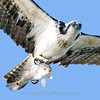 "Osprey with fish © 2009 C. M. Neri.  Laguna Atascosa NWR, TX OSPRCP  <div class=""ss-paypal-button""><div class=""ss-paypal-add-to-cart-section""><div class=""ss-paypal-product-options""><h4>Mat Sizes</h4><ul><li><a href=""https://www.paypal.com/cgi-bin/webscr?cmd=_cart&business=T77V5VKCW4K2U&lc=US&item_name=Osprey%20with%20fish%20%C2%A9%202009%20C.%20M.%20Neri.%20%20Laguna%20Atascosa%20NWR%2C%20TX%20OSPRCP&item_number=http%3A%2F%2Fwww.nightflightimages.com%2FGalleries-1%2FHawks%2Fi-sqvk4Wm&button_subtype=products&no_note=0&cn=Add%20special%20instructions%20to%20the%20seller%3A&no_shipping=2&currency_code=USD&weight_unit=lbs&add=1&bn=PP-ShopCartBF%3Abtn_cart_SM.gif%3ANonHosted&on0=Mat%20Sizes&option_select0=5%20x%207&option_amount0=10.00&option_select1=8%20x%2010&option_amount1=18.00&option_select2=11%20x%2014&option_amount2=28.00&option_select3=card&option_amount3=4.00&option_index=0&charset=utf-8&submit=&os0=5%20x%207"" target=""paypal""><span>5 x 7 $11.00 USD</span><img src=""https://www.paypalobjects.com/en_US/i/btn/btn_cart_SM.gif""></a></li><li><a href=""https://www.paypal.com/cgi-bin/webscr?cmd=_cart&business=T77V5VKCW4K2U&lc=US&item_name=Osprey%20with%20fish%20%C2%A9%202009%20C.%20M.%20Neri.%20%20Laguna%20Atascosa%20NWR%2C%20TX%20OSPRCP&item_number=http%3A%2F%2Fwww.nightflightimages.com%2FGalleries-1%2FHawks%2Fi-sqvk4Wm&button_subtype=products&no_note=0&cn=Add%20special%20instructions%20to%20the%20seller%3A&no_shipping=2&currency_code=USD&weight_unit=lbs&add=1&bn=PP-ShopCartBF%3Abtn_cart_SM.gif%3ANonHosted&on0=Mat%20Sizes&option_select0=5%20x%207&option_amount0=10.00&option_select1=8%20x%2010&option_amount1=18.00&option_select2=11%20x%2014&option_amount2=28.00&option_select3=card&option_amount3=4.00&option_index=0&charset=utf-8&submit=&os0=8%20x%2010"" target=""paypal""><span>8 x 10 $19.00 USD</span><img src=""https://www.paypalobjects.com/en_US/i/btn/btn_cart_SM.gif""></a></li><li><a href=""https://www.paypal.com/cgi-bin/webscr?cmd=_cart&business=T77V5VKCW4K2U&lc=US&item_name=Osprey%20with%20fish%20%C2%A9%202009%20C.%20M.%20Neri.%20%20Laguna%20Atascosa%20NWR%2C%20TX%20OSPRCP&item_number=http%3A%2F%2Fwww.nightflightimages.com%2FGalleries-1%2FHawks%2Fi-sqvk4Wm&button_subtype=products&no_note=0&cn=Add%20special%20instructions%20to%20the%20seller%3A&no_shipping=2&currency_code=USD&weight_unit=lbs&add=1&bn=PP-ShopCartBF%3Abtn_cart_SM.gif%3ANonHosted&on0=Mat%20Sizes&option_select0=5%20x%207&option_amount0=10.00&option_select1=8%20x%2010&option_amount1=18.00&option_select2=11%20x%2014&option_amount2=28.00&option_select3=card&option_amount3=4.00&option_index=0&charset=utf-8&submit=&os0=11%20x%2014"" target=""paypal""><span>11 x 14 $29.00 USD</span><img src=""https://www.paypalobjects.com/en_US/i/btn/btn_cart_SM.gif""></a></li><li><a href=""https://www.paypal.com/cgi-bin/webscr?cmd=_cart&business=T77V5VKCW4K2U&lc=US&item_name=Osprey%20with%20fish%20%C2%A9%202009%20C.%20M.%20Neri.%20%20Laguna%20Atascosa%20NWR%2C%20TX%20OSPRCP&item_number=http%3A%2F%2Fwww.nightflightimages.com%2FGalleries-1%2FHawks%2Fi-sqvk4Wm&button_subtype=products&no_note=0&cn=Add%20special%20instructions%20to%20the%20seller%3A&no_shipping=2&currency_code=USD&weight_unit=lbs&add=1&bn=PP-ShopCartBF%3Abtn_cart_SM.gif%3ANonHosted&on0=Mat%20Sizes&option_select0=5%20x%207&option_amount0=10.00&option_select1=8%20x%2010&option_amount1=18.00&option_select2=11%20x%2014&option_amount2=28.00&option_select3=card&option_amount3=4.00&option_index=0&charset=utf-8&submit=&os0=card"" target=""paypal""><span>card $5.00 USD</span><img src=""https://www.paypalobjects.com/en_US/i/btn/btn_cart_SM.gif""></a></li></ul></div></div> <div class=""ss-paypal-view-cart-section""><a href=""https://www.paypal.com/cgi-bin/webscr?cmd=_cart&business=T77V5VKCW4K2U&display=1&item_name=Osprey%20with%20fish%20%C2%A9%202009%20C.%20M.%20Neri.%20%20Laguna%20Atascosa%20NWR%2C%20TX%20OSPRCP&item_number=http%3A%2F%2Fwww.nightflightimages.com%2FGalleries-1%2FHawks%2Fi-sqvk4Wm&charset=utf-8&submit="" target=""paypal"" class=""ss-paypal-submit-button""><img src=""https://www.paypalobjects.com/en_US/i/btn/btn_viewcart_LG.gif""></a></div></div><div class=""ss-paypal-button-end""></div>"