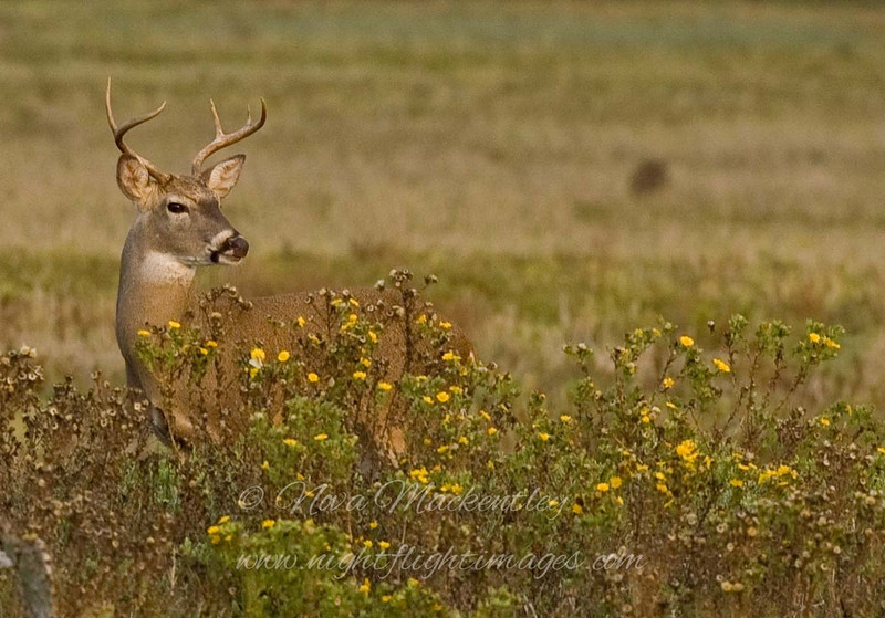 "Buck in Flowers © 2007 Nova Mackentley Laguna Atascosa NWR, TX DEF  <div class=""ss-paypal-button""><div class=""ss-paypal-add-to-cart-section""><div class=""ss-paypal-product-options""><h4>Mat Sizes</h4><ul><li><a href=""https://www.paypal.com/cgi-bin/webscr?cmd=_cart&amp;business=T77V5VKCW4K2U&amp;lc=US&amp;item_name=Buck%20in%20Flowers%20%C2%A9%202007%20Nova%20Mackentley%20Laguna%20Atascosa%20NWR%2C%20TX%20DEF&amp;item_number=http%3A%2F%2Fwww.nightflightimages.com%2FGalleries-1%2FMammals%2Fi-vh8MmBd&amp;button_subtype=products&amp;no_note=0&amp;cn=Add%20special%20instructions%20to%20the%20seller%3A&amp;no_shipping=2&amp;currency_code=USD&amp;weight_unit=lbs&amp;add=1&amp;bn=PP-ShopCartBF%3Abtn_cart_SM.gif%3ANonHosted&amp;on0=Mat%20Sizes&amp;option_select0=5%20x%207&amp;option_amount0=10.00&amp;option_select1=8%20x%2010&amp;option_amount1=18.00&amp;option_select2=11%20x%2014&amp;option_amount2=28.00&amp;option_select3=card&amp;option_amount3=4.00&amp;option_index=0&amp;charset=utf-8&amp;submit=&amp;os0=5%20x%207"" target=""paypal""><span>5 x 7 $11.00 USD</span><img src=""https://www.paypalobjects.com/en_US/i/btn/btn_cart_SM.gif""></a></li><li><a href=""https://www.paypal.com/cgi-bin/webscr?cmd=_cart&amp;business=T77V5VKCW4K2U&amp;lc=US&amp;item_name=Buck%20in%20Flowers%20%C2%A9%202007%20Nova%20Mackentley%20Laguna%20Atascosa%20NWR%2C%20TX%20DEF&amp;item_number=http%3A%2F%2Fwww.nightflightimages.com%2FGalleries-1%2FMammals%2Fi-vh8MmBd&amp;button_subtype=products&amp;no_note=0&amp;cn=Add%20special%20instructions%20to%20the%20seller%3A&amp;no_shipping=2&amp;currency_code=USD&amp;weight_unit=lbs&amp;add=1&amp;bn=PP-ShopCartBF%3Abtn_cart_SM.gif%3ANonHosted&amp;on0=Mat%20Sizes&amp;option_select0=5%20x%207&amp;option_amount0=10.00&amp;option_select1=8%20x%2010&amp;option_amount1=18.00&amp;option_select2=11%20x%2014&amp;option_amount2=28.00&amp;option_select3=card&amp;option_amount3=4.00&amp;option_index=0&amp;charset=utf-8&amp;submit=&amp;os0=8%20x%2010"" target=""paypal""><span>8 x 10 $19.00 USD</span><img src=""https://www.paypalobjects.com/en_US/i/btn/btn_cart_SM.gif""></a></li><li><a href=""https://www.paypal.com/cgi-bin/webscr?cmd=_cart&amp;business=T77V5VKCW4K2U&amp;lc=US&amp;item_name=Buck%20in%20Flowers%20%C2%A9%202007%20Nova%20Mackentley%20Laguna%20Atascosa%20NWR%2C%20TX%20DEF&amp;item_number=http%3A%2F%2Fwww.nightflightimages.com%2FGalleries-1%2FMammals%2Fi-vh8MmBd&amp;button_subtype=products&amp;no_note=0&amp;cn=Add%20special%20instructions%20to%20the%20seller%3A&amp;no_shipping=2&amp;currency_code=USD&amp;weight_unit=lbs&amp;add=1&amp;bn=PP-ShopCartBF%3Abtn_cart_SM.gif%3ANonHosted&amp;on0=Mat%20Sizes&amp;option_select0=5%20x%207&amp;option_amount0=10.00&amp;option_select1=8%20x%2010&amp;option_amount1=18.00&amp;option_select2=11%20x%2014&amp;option_amount2=28.00&amp;option_select3=card&amp;option_amount3=4.00&amp;option_index=0&amp;charset=utf-8&amp;submit=&amp;os0=11%20x%2014"" target=""paypal""><span>11 x 14 $29.00 USD</span><img src=""https://www.paypalobjects.com/en_US/i/btn/btn_cart_SM.gif""></a></li><li><a href=""https://www.paypal.com/cgi-bin/webscr?cmd=_cart&amp;business=T77V5VKCW4K2U&amp;lc=US&amp;item_name=Buck%20in%20Flowers%20%C2%A9%202007%20Nova%20Mackentley%20Laguna%20Atascosa%20NWR%2C%20TX%20DEF&amp;item_number=http%3A%2F%2Fwww.nightflightimages.com%2FGalleries-1%2FMammals%2Fi-vh8MmBd&amp;button_subtype=products&amp;no_note=0&amp;cn=Add%20special%20instructions%20to%20the%20seller%3A&amp;no_shipping=2&amp;currency_code=USD&amp;weight_unit=lbs&amp;add=1&amp;bn=PP-ShopCartBF%3Abtn_cart_SM.gif%3ANonHosted&amp;on0=Mat%20Sizes&amp;option_select0=5%20x%207&amp;option_amount0=10.00&amp;option_select1=8%20x%2010&amp;option_amount1=18.00&amp;option_select2=11%20x%2014&amp;option_amount2=28.00&amp;option_select3=card&amp;option_amount3=4.00&amp;option_index=0&amp;charset=utf-8&amp;submit=&amp;os0=card"" target=""paypal""><span>card $5.00 USD</span><img src=""https://www.paypalobjects.com/en_US/i/btn/btn_cart_SM.gif""></a></li></ul></div></div> <div class=""ss-paypal-view-cart-section""><a href=""https://www.paypal.com/cgi-bin/webscr?cmd=_cart&amp;business=T77V5VKCW4K2U&amp;display=1&amp;item_name=Buck%20in%20Flowers%20%C2%A9%202007%20Nova%20Mackentley%20Laguna%20Atascosa%20NWR%2C%20TX%20DEF&amp;item_number=http%3A%2F%2Fwww.nightflightimages.com%2FGalleries-1%2FMammals%2Fi-vh8MmBd&amp;charset=utf-8&amp;submit="" target=""paypal"" class=""ss-paypal-submit-button""><img src=""https://www.paypalobjects.com/en_US/i/btn/btn_viewcart_LG.gif""></a></div></div><div class=""ss-paypal-button-end""></div>"