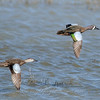"Blue-winged Teal © 2009 C. M. Neri.  Laguna Atascosa NWR, TX BWTE  <div class=""ss-paypal-button""> <div class=""ss-paypal-add-to-cart-section""><div class=""ss-paypal-product-options""> <h4>Mat Sizes</h4> <ul> <li><a href=""https://www.paypal.com/cgi-bin/webscr?cmd=_cart&business=T77V5VKCW4K2U&lc=US&item_name=Blue-winged%20Teal%20%C2%A9%202009%20C.%20M.%20Neri.%20%20Laguna%20Atascosa%20NWR%2C%20TX%20BWTE&item_number=http%3A%2F%2Fwww.nightflightimages.com%2FGalleries-1%2FLower-Rio-Grande-Valley-TX%2Fi-w92H5cv&button_subtype=products&no_note=0&cn=Add%20special%20instructions%20to%20the%20seller%3A&no_shipping=2&currency_code=USD&weight_unit=lbs&add=1&bn=PP-ShopCartBF%3Abtn_cart_SM.gif%3ANonHosted&on0=Mat%20Sizes&option_select0=5%20x%207&option_amount0=10.00&option_select1=8%20x%2010&option_amount1=18.00&option_select2=11%20x%2014&option_amount2=28.00&option_select3=card&option_amount3=4.00&option_index=0&submit=&os0=5%20x%207"" target=""paypal""><span>5 x 7 $10.00 USD</span><img src=""https://www.paypalobjects.com/en_US/i/btn/btn_cart_SM.gif""></a></li> <li><a href=""https://www.paypal.com/cgi-bin/webscr?cmd=_cart&business=T77V5VKCW4K2U&lc=US&item_name=Blue-winged%20Teal%20%C2%A9%202009%20C.%20M.%20Neri.%20%20Laguna%20Atascosa%20NWR%2C%20TX%20BWTE&item_number=http%3A%2F%2Fwww.nightflightimages.com%2FGalleries-1%2FLower-Rio-Grande-Valley-TX%2Fi-w92H5cv&button_subtype=products&no_note=0&cn=Add%20special%20instructions%20to%20the%20seller%3A&no_shipping=2&currency_code=USD&weight_unit=lbs&add=1&bn=PP-ShopCartBF%3Abtn_cart_SM.gif%3ANonHosted&on0=Mat%20Sizes&option_select0=5%20x%207&option_amount0=10.00&option_select1=8%20x%2010&option_amount1=18.00&option_select2=11%20x%2014&option_amount2=28.00&option_select3=card&option_amount3=4.00&option_index=0&submit=&os0=8%20x%2010"" target=""paypal""><span>8 x 10 $18.00 USD</span><img src=""https://www.paypalobjects.com/en_US/i/btn/btn_cart_SM.gif""></a></li> <li><a href=""https://www.paypal.com/cgi-bin/webscr?cmd=_cart&business=T77V5VKCW4K2U&lc=US&item_name=Blue-winged%20Teal%20%C2%A9%202009%20C.%20M.%20Neri.%20%20Laguna%20Atascosa%20NWR%2C%20TX%20BWTE&item_number=http%3A%2F%2Fwww.nightflightimages.com%2FGalleries-1%2FLower-Rio-Grande-Valley-TX%2Fi-w92H5cv&button_subtype=products&no_note=0&cn=Add%20special%20instructions%20to%20the%20seller%3A&no_shipping=2&currency_code=USD&weight_unit=lbs&add=1&bn=PP-ShopCartBF%3Abtn_cart_SM.gif%3ANonHosted&on0=Mat%20Sizes&option_select0=5%20x%207&option_amount0=10.00&option_select1=8%20x%2010&option_amount1=18.00&option_select2=11%20x%2014&option_amount2=28.00&option_select3=card&option_amount3=4.00&option_index=0&submit=&os0=11%20x%2014"" target=""paypal""><span>11 x 14 $28.00 USD</span><img src=""https://www.paypalobjects.com/en_US/i/btn/btn_cart_SM.gif""></a></li> <li><a href=""https://www.paypal.com/cgi-bin/webscr?cmd=_cart&business=T77V5VKCW4K2U&lc=US&item_name=Blue-winged%20Teal%20%C2%A9%202009%20C.%20M.%20Neri.%20%20Laguna%20Atascosa%20NWR%2C%20TX%20BWTE&item_number=http%3A%2F%2Fwww.nightflightimages.com%2FGalleries-1%2FLower-Rio-Grande-Valley-TX%2Fi-w92H5cv&button_subtype=products&no_note=0&cn=Add%20special%20instructions%20to%20the%20seller%3A&no_shipping=2&currency_code=USD&weight_unit=lbs&add=1&bn=PP-ShopCartBF%3Abtn_cart_SM.gif%3ANonHosted&on0=Mat%20Sizes&option_select0=5%20x%207&option_amount0=10.00&option_select1=8%20x%2010&option_amount1=18.00&option_select2=11%20x%2014&option_amount2=28.00&option_select3=card&option_amount3=4.00&option_index=0&submit=&os0=card"" target=""paypal""><span>card $4.00 USD</span><img src=""https://www.paypalobjects.com/en_US/i/btn/btn_cart_SM.gif""></a></li> </ul> </div></div> <div class=""ss-paypal-view-cart-section""><a href=""https://www.paypal.com/cgi-bin/webscr?cmd=_cart&business=T77V5VKCW4K2U&display=1&item_name=Blue-winged%20Teal%20%C2%A9%202009%20C.%20M.%20Neri.%20%20Laguna%20Atascosa%20NWR%2C%20TX%20BWTE&item_number=http%3A%2F%2Fwww.nightflightimages.com%2FGalleries-1%2FLower-Rio-Grande-Valley-TX%2Fi-w92H5cv&submit="" target=""paypal"" class=""ss-paypal-submit-button""><img src=""https://www.paypalobjects.com/en_US/i/btn/btn_viewcart_LG.gif""></a></div> </div><div class=""ss-paypal-button-end"" style=""""></div>"