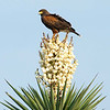 "Harris's Hawk on Yucca © 2009 C. M. Neri Laguna Atascosa NWR, TX HAHAYUCCA  <div class=""ss-paypal-button""><div class=""ss-paypal-add-to-cart-section""><div class=""ss-paypal-product-options""><h4>Mat Sizes</h4><ul><li><a href=""https://www.paypal.com/cgi-bin/webscr?cmd=_cart&business=T77V5VKCW4K2U&lc=US&item_name=Harris's%20Hawk%20on%20Yucca%20%C2%A9%202009%20C.%20M.%20Neri%20Laguna%20Atascosa%20NWR%2C%20TX%20HAHAYUCCA&item_number=http%3A%2F%2Fwww.nightflightimages.com%2FGalleries-1%2FHawks%2Fi-wdZW5FM&button_subtype=products&no_note=0&cn=Add%20special%20instructions%20to%20the%20seller%3A&no_shipping=2&currency_code=USD&weight_unit=lbs&add=1&bn=PP-ShopCartBF%3Abtn_cart_SM.gif%3ANonHosted&on0=Mat%20Sizes&option_select0=5%20x%207&option_amount0=10.00&option_select1=8%20x%2010&option_amount1=18.00&option_select2=11%20x%2014&option_amount2=28.00&option_select3=card&option_amount3=4.00&option_index=0&charset=utf-8&submit=&os0=5%20x%207"" target=""paypal""><span>5 x 7 $11.00 USD</span><img src=""https://www.paypalobjects.com/en_US/i/btn/btn_cart_SM.gif""></a></li><li><a href=""https://www.paypal.com/cgi-bin/webscr?cmd=_cart&business=T77V5VKCW4K2U&lc=US&item_name=Harris's%20Hawk%20on%20Yucca%20%C2%A9%202009%20C.%20M.%20Neri%20Laguna%20Atascosa%20NWR%2C%20TX%20HAHAYUCCA&item_number=http%3A%2F%2Fwww.nightflightimages.com%2FGalleries-1%2FHawks%2Fi-wdZW5FM&button_subtype=products&no_note=0&cn=Add%20special%20instructions%20to%20the%20seller%3A&no_shipping=2&currency_code=USD&weight_unit=lbs&add=1&bn=PP-ShopCartBF%3Abtn_cart_SM.gif%3ANonHosted&on0=Mat%20Sizes&option_select0=5%20x%207&option_amount0=10.00&option_select1=8%20x%2010&option_amount1=18.00&option_select2=11%20x%2014&option_amount2=28.00&option_select3=card&option_amount3=4.00&option_index=0&charset=utf-8&submit=&os0=8%20x%2010"" target=""paypal""><span>8 x 10 $19.00 USD</span><img src=""https://www.paypalobjects.com/en_US/i/btn/btn_cart_SM.gif""></a></li><li><a href=""https://www.paypal.com/cgi-bin/webscr?cmd=_cart&business=T77V5VKCW4K2U&lc=US&item_name=Harris's%20Hawk%20on%20Yucca%20%C2%A9%202009%20C.%20M.%20Neri%20Laguna%20Atascosa%20NWR%2C%20TX%20HAHAYUCCA&item_number=http%3A%2F%2Fwww.nightflightimages.com%2FGalleries-1%2FHawks%2Fi-wdZW5FM&button_subtype=products&no_note=0&cn=Add%20special%20instructions%20to%20the%20seller%3A&no_shipping=2&currency_code=USD&weight_unit=lbs&add=1&bn=PP-ShopCartBF%3Abtn_cart_SM.gif%3ANonHosted&on0=Mat%20Sizes&option_select0=5%20x%207&option_amount0=10.00&option_select1=8%20x%2010&option_amount1=18.00&option_select2=11%20x%2014&option_amount2=28.00&option_select3=card&option_amount3=4.00&option_index=0&charset=utf-8&submit=&os0=11%20x%2014"" target=""paypal""><span>11 x 14 $29.00 USD</span><img src=""https://www.paypalobjects.com/en_US/i/btn/btn_cart_SM.gif""></a></li><li><a href=""https://www.paypal.com/cgi-bin/webscr?cmd=_cart&business=T77V5VKCW4K2U&lc=US&item_name=Harris's%20Hawk%20on%20Yucca%20%C2%A9%202009%20C.%20M.%20Neri%20Laguna%20Atascosa%20NWR%2C%20TX%20HAHAYUCCA&item_number=http%3A%2F%2Fwww.nightflightimages.com%2FGalleries-1%2FHawks%2Fi-wdZW5FM&button_subtype=products&no_note=0&cn=Add%20special%20instructions%20to%20the%20seller%3A&no_shipping=2&currency_code=USD&weight_unit=lbs&add=1&bn=PP-ShopCartBF%3Abtn_cart_SM.gif%3ANonHosted&on0=Mat%20Sizes&option_select0=5%20x%207&option_amount0=10.00&option_select1=8%20x%2010&option_amount1=18.00&option_select2=11%20x%2014&option_amount2=28.00&option_select3=card&option_amount3=4.00&option_index=0&charset=utf-8&submit=&os0=card"" target=""paypal""><span>card $5.00 USD</span><img src=""https://www.paypalobjects.com/en_US/i/btn/btn_cart_SM.gif""></a></li></ul></div></div> <div class=""ss-paypal-view-cart-section""><a href=""https://www.paypal.com/cgi-bin/webscr?cmd=_cart&business=T77V5VKCW4K2U&display=1&item_name=Harris's%20Hawk%20on%20Yucca%20%C2%A9%202009%20C.%20M.%20Neri%20Laguna%20Atascosa%20NWR%2C%20TX%20HAHAYUCCA&item_number=http%3A%2F%2Fwww.nightflightimages.com%2FGalleries-1%2FHawks%2Fi-wdZW5FM&charset=utf-8&submit="" target=""paypal"" class=""ss-paypal-submit-button""><img src=""https://www.paypalobjects.com/en_US/i/btn/btn_viewcart_LG.gif""></a></div></div><div class=""ss-paypal-button-end""></div>"