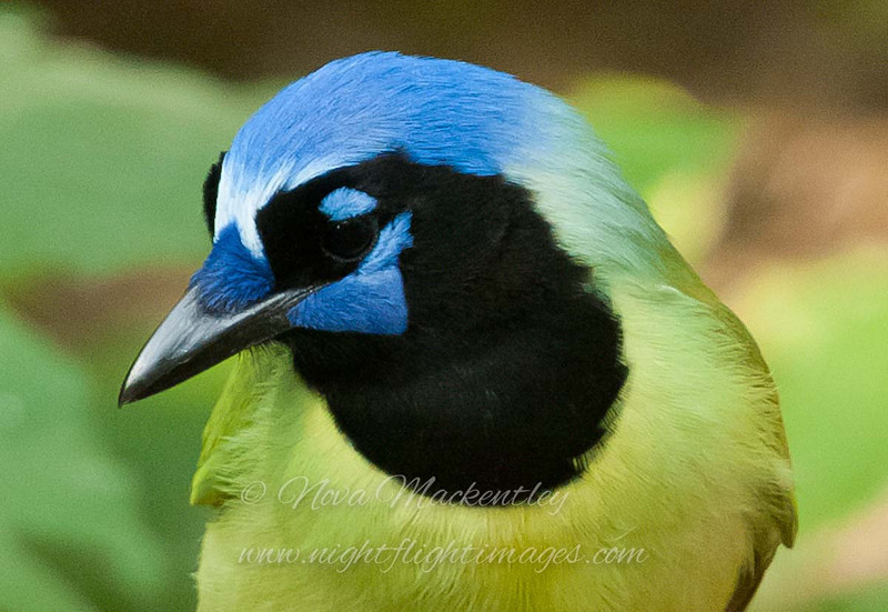 "Green Jay © 2010 Nova Mackentley Laguna Atascosa NWR, TX GJH  <div class=""ss-paypal-button""> <div class=""ss-paypal-add-to-cart-section""><div class=""ss-paypal-product-options""> <h4>Mat Sizes</h4> <ul> <li><a href=""https://www.paypal.com/cgi-bin/webscr?cmd=_cart&business=T77V5VKCW4K2U&lc=US&item_name=Green%20Jay%20%C2%A9%202010%20Nova%20Mackentley%20Laguna%20Atascosa%20NWR%2C%20TX%20GJH&item_number=http%3A%2F%2Fwww.nightflightimages.com%2FGalleries-1%2FLower-Rio-Grande-Valley-TX%2Fi-xcZHQZD&button_subtype=products&no_note=0&cn=Add%20special%20instructions%20to%20the%20seller%3A&no_shipping=2&currency_code=USD&weight_unit=lbs&add=1&bn=PP-ShopCartBF%3Abtn_cart_SM.gif%3ANonHosted&on0=Mat%20Sizes&option_select0=5%20x%207&option_amount0=10.00&option_select1=8%20x%2010&option_amount1=18.00&option_select2=11%20x%2014&option_amount2=28.00&option_select3=card&option_amount3=4.00&option_index=0&submit=&os0=5%20x%207"" target=""paypal""><span>5 x 7 $10.00 USD</span><img src=""https://www.paypalobjects.com/en_US/i/btn/btn_cart_SM.gif""></a></li> <li><a href=""https://www.paypal.com/cgi-bin/webscr?cmd=_cart&business=T77V5VKCW4K2U&lc=US&item_name=Green%20Jay%20%C2%A9%202010%20Nova%20Mackentley%20Laguna%20Atascosa%20NWR%2C%20TX%20GJH&item_number=http%3A%2F%2Fwww.nightflightimages.com%2FGalleries-1%2FLower-Rio-Grande-Valley-TX%2Fi-xcZHQZD&button_subtype=products&no_note=0&cn=Add%20special%20instructions%20to%20the%20seller%3A&no_shipping=2&currency_code=USD&weight_unit=lbs&add=1&bn=PP-ShopCartBF%3Abtn_cart_SM.gif%3ANonHosted&on0=Mat%20Sizes&option_select0=5%20x%207&option_amount0=10.00&option_select1=8%20x%2010&option_amount1=18.00&option_select2=11%20x%2014&option_amount2=28.00&option_select3=card&option_amount3=4.00&option_index=0&submit=&os0=8%20x%2010"" target=""paypal""><span>8 x 10 $18.00 USD</span><img src=""https://www.paypalobjects.com/en_US/i/btn/btn_cart_SM.gif""></a></li> <li><a href=""https://www.paypal.com/cgi-bin/webscr?cmd=_cart&business=T77V5VKCW4K2U&lc=US&item_name=Green%20Jay%20%C2%A9%202010%20Nova%20Mackentley%20Laguna%20Atascosa%20NWR%2C%20TX%20GJH&item_number=http%3A%2F%2Fwww.nightflightimages.com%2FGalleries-1%2FLower-Rio-Grande-Valley-TX%2Fi-xcZHQZD&button_subtype=products&no_note=0&cn=Add%20special%20instructions%20to%20the%20seller%3A&no_shipping=2&currency_code=USD&weight_unit=lbs&add=1&bn=PP-ShopCartBF%3Abtn_cart_SM.gif%3ANonHosted&on0=Mat%20Sizes&option_select0=5%20x%207&option_amount0=10.00&option_select1=8%20x%2010&option_amount1=18.00&option_select2=11%20x%2014&option_amount2=28.00&option_select3=card&option_amount3=4.00&option_index=0&submit=&os0=11%20x%2014"" target=""paypal""><span>11 x 14 $28.00 USD</span><img src=""https://www.paypalobjects.com/en_US/i/btn/btn_cart_SM.gif""></a></li> <li><a href=""https://www.paypal.com/cgi-bin/webscr?cmd=_cart&business=T77V5VKCW4K2U&lc=US&item_name=Green%20Jay%20%C2%A9%202010%20Nova%20Mackentley%20Laguna%20Atascosa%20NWR%2C%20TX%20GJH&item_number=http%3A%2F%2Fwww.nightflightimages.com%2FGalleries-1%2FLower-Rio-Grande-Valley-TX%2Fi-xcZHQZD&button_subtype=products&no_note=0&cn=Add%20special%20instructions%20to%20the%20seller%3A&no_shipping=2&currency_code=USD&weight_unit=lbs&add=1&bn=PP-ShopCartBF%3Abtn_cart_SM.gif%3ANonHosted&on0=Mat%20Sizes&option_select0=5%20x%207&option_amount0=10.00&option_select1=8%20x%2010&option_amount1=18.00&option_select2=11%20x%2014&option_amount2=28.00&option_select3=card&option_amount3=4.00&option_index=0&submit=&os0=card"" target=""paypal""><span>card $4.00 USD</span><img src=""https://www.paypalobjects.com/en_US/i/btn/btn_cart_SM.gif""></a></li> </ul> </div></div> <div class=""ss-paypal-view-cart-section""><a href=""https://www.paypal.com/cgi-bin/webscr?cmd=_cart&business=T77V5VKCW4K2U&display=1&item_name=Green%20Jay%20%C2%A9%202010%20Nova%20Mackentley%20Laguna%20Atascosa%20NWR%2C%20TX%20GJH&item_number=http%3A%2F%2Fwww.nightflightimages.com%2FGalleries-1%2FLower-Rio-Grande-Valley-TX%2Fi-xcZHQZD&submit="" target=""paypal"" class=""ss-paypal-submit-button""><img src=""https://www.paypalobjects.com/en_US/i/btn/btn_viewcart_LG.gif""></a></div> </div><div class=""ss-paypal-button-end"" style=""""></div>"