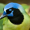 "Green Jay © 2010 Nova Mackentley Laguna Atascosa NWR, TX GJH  <div class=""ss-paypal-button""> <div class=""ss-paypal-add-to-cart-section""><div class=""ss-paypal-product-options""> <h4>Mat Sizes</h4> <ul> <li><a href=""https://www.paypal.com/cgi-bin/webscr?cmd=_cart&amp;business=T77V5VKCW4K2U&amp;lc=US&amp;item_name=Green%20Jay%20%C2%A9%202010%20Nova%20Mackentley%20Laguna%20Atascosa%20NWR%2C%20TX%20GJH&amp;item_number=http%3A%2F%2Fwww.nightflightimages.com%2FGalleries-1%2FLower-Rio-Grande-Valley-TX%2Fi-xcZHQZD&amp;button_subtype=products&amp;no_note=0&amp;cn=Add%20special%20instructions%20to%20the%20seller%3A&amp;no_shipping=2&amp;currency_code=USD&amp;weight_unit=lbs&amp;add=1&amp;bn=PP-ShopCartBF%3Abtn_cart_SM.gif%3ANonHosted&amp;on0=Mat%20Sizes&amp;option_select0=5%20x%207&amp;option_amount0=10.00&amp;option_select1=8%20x%2010&amp;option_amount1=18.00&amp;option_select2=11%20x%2014&amp;option_amount2=28.00&amp;option_select3=card&amp;option_amount3=4.00&amp;option_index=0&amp;submit=&amp;os0=5%20x%207"" target=""paypal""><span>5 x 7 $10.00 USD</span><img src=""https://www.paypalobjects.com/en_US/i/btn/btn_cart_SM.gif""></a></li> <li><a href=""https://www.paypal.com/cgi-bin/webscr?cmd=_cart&amp;business=T77V5VKCW4K2U&amp;lc=US&amp;item_name=Green%20Jay%20%C2%A9%202010%20Nova%20Mackentley%20Laguna%20Atascosa%20NWR%2C%20TX%20GJH&amp;item_number=http%3A%2F%2Fwww.nightflightimages.com%2FGalleries-1%2FLower-Rio-Grande-Valley-TX%2Fi-xcZHQZD&amp;button_subtype=products&amp;no_note=0&amp;cn=Add%20special%20instructions%20to%20the%20seller%3A&amp;no_shipping=2&amp;currency_code=USD&amp;weight_unit=lbs&amp;add=1&amp;bn=PP-ShopCartBF%3Abtn_cart_SM.gif%3ANonHosted&amp;on0=Mat%20Sizes&amp;option_select0=5%20x%207&amp;option_amount0=10.00&amp;option_select1=8%20x%2010&amp;option_amount1=18.00&amp;option_select2=11%20x%2014&amp;option_amount2=28.00&amp;option_select3=card&amp;option_amount3=4.00&amp;option_index=0&amp;submit=&amp;os0=8%20x%2010"" target=""paypal""><span>8 x 10 $18.00 USD</span><img src=""https://www.paypalobjects.com/en_US/i/btn/btn_cart_SM.gif""></a></li> <li><a href=""https://www.paypal.com/cgi-bin/webscr?cmd=_cart&amp;business=T77V5VKCW4K2U&amp;lc=US&amp;item_name=Green%20Jay%20%C2%A9%202010%20Nova%20Mackentley%20Laguna%20Atascosa%20NWR%2C%20TX%20GJH&amp;item_number=http%3A%2F%2Fwww.nightflightimages.com%2FGalleries-1%2FLower-Rio-Grande-Valley-TX%2Fi-xcZHQZD&amp;button_subtype=products&amp;no_note=0&amp;cn=Add%20special%20instructions%20to%20the%20seller%3A&amp;no_shipping=2&amp;currency_code=USD&amp;weight_unit=lbs&amp;add=1&amp;bn=PP-ShopCartBF%3Abtn_cart_SM.gif%3ANonHosted&amp;on0=Mat%20Sizes&amp;option_select0=5%20x%207&amp;option_amount0=10.00&amp;option_select1=8%20x%2010&amp;option_amount1=18.00&amp;option_select2=11%20x%2014&amp;option_amount2=28.00&amp;option_select3=card&amp;option_amount3=4.00&amp;option_index=0&amp;submit=&amp;os0=11%20x%2014"" target=""paypal""><span>11 x 14 $28.00 USD</span><img src=""https://www.paypalobjects.com/en_US/i/btn/btn_cart_SM.gif""></a></li> <li><a href=""https://www.paypal.com/cgi-bin/webscr?cmd=_cart&amp;business=T77V5VKCW4K2U&amp;lc=US&amp;item_name=Green%20Jay%20%C2%A9%202010%20Nova%20Mackentley%20Laguna%20Atascosa%20NWR%2C%20TX%20GJH&amp;item_number=http%3A%2F%2Fwww.nightflightimages.com%2FGalleries-1%2FLower-Rio-Grande-Valley-TX%2Fi-xcZHQZD&amp;button_subtype=products&amp;no_note=0&amp;cn=Add%20special%20instructions%20to%20the%20seller%3A&amp;no_shipping=2&amp;currency_code=USD&amp;weight_unit=lbs&amp;add=1&amp;bn=PP-ShopCartBF%3Abtn_cart_SM.gif%3ANonHosted&amp;on0=Mat%20Sizes&amp;option_select0=5%20x%207&amp;option_amount0=10.00&amp;option_select1=8%20x%2010&amp;option_amount1=18.00&amp;option_select2=11%20x%2014&amp;option_amount2=28.00&amp;option_select3=card&amp;option_amount3=4.00&amp;option_index=0&amp;submit=&amp;os0=card"" target=""paypal""><span>card $4.00 USD</span><img src=""https://www.paypalobjects.com/en_US/i/btn/btn_cart_SM.gif""></a></li> </ul> </div></div> <div class=""ss-paypal-view-cart-section""><a href=""https://www.paypal.com/cgi-bin/webscr?cmd=_cart&amp;business=T77V5VKCW4K2U&amp;display=1&amp;item_name=Green%20Jay%20%C2%A9%202010%20Nova%20Mackentley%20Laguna%20Atascosa%20NWR%2C%20TX%20GJH&amp;item_number=http%3A%2F%2Fwww.nightflightimages.com%2FGalleries-1%2FLower-Rio-Grande-Valley-TX%2Fi-xcZHQZD&amp;submit="" target=""paypal"" class=""ss-paypal-submit-button""><img src=""https://www.paypalobjects.com/en_US/i/btn/btn_viewcart_LG.gif""></a></div> </div><div class=""ss-paypal-button-end"" style=""""></div>"