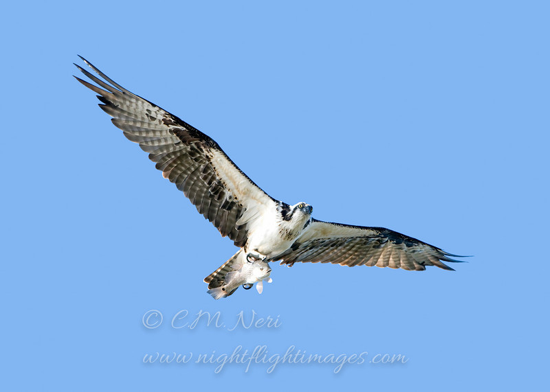 "Osprey with fish © 2009 C. M. Neri.  Laguna Atascosa NWR, TX OSPRTX  <div class=""ss-paypal-button""><div class=""ss-paypal-add-to-cart-section""><div class=""ss-paypal-product-options""><h4>Mat Sizes</h4><ul><li><a href=""https://www.paypal.com/cgi-bin/webscr?cmd=_cart&amp;business=T77V5VKCW4K2U&amp;lc=US&amp;item_name=Osprey%20with%20fish%20%C2%A9%202009%20C.%20M.%20Neri.%20%20Laguna%20Atascosa%20NWR%2C%20TX%20OSPRTX&amp;item_number=http%3A%2F%2Fwww.nightflightimages.com%2FGalleries-1%2FHawks%2Fi-zX52Zn8&amp;button_subtype=products&amp;no_note=0&amp;cn=Add%20special%20instructions%20to%20the%20seller%3A&amp;no_shipping=2&amp;currency_code=USD&amp;weight_unit=lbs&amp;add=1&amp;bn=PP-ShopCartBF%3Abtn_cart_SM.gif%3ANonHosted&amp;on0=Mat%20Sizes&amp;option_select0=5%20x%207&amp;option_amount0=10.00&amp;option_select1=8%20x%2010&amp;option_amount1=18.00&amp;option_select2=11%20x%2014&amp;option_amount2=28.00&amp;option_select3=card&amp;option_amount3=4.00&amp;option_index=0&amp;charset=utf-8&amp;submit=&amp;os0=5%20x%207"" target=""paypal""><span>5 x 7 $11.00 USD</span><img src=""https://www.paypalobjects.com/en_US/i/btn/btn_cart_SM.gif""></a></li><li><a href=""https://www.paypal.com/cgi-bin/webscr?cmd=_cart&amp;business=T77V5VKCW4K2U&amp;lc=US&amp;item_name=Osprey%20with%20fish%20%C2%A9%202009%20C.%20M.%20Neri.%20%20Laguna%20Atascosa%20NWR%2C%20TX%20OSPRTX&amp;item_number=http%3A%2F%2Fwww.nightflightimages.com%2FGalleries-1%2FHawks%2Fi-zX52Zn8&amp;button_subtype=products&amp;no_note=0&amp;cn=Add%20special%20instructions%20to%20the%20seller%3A&amp;no_shipping=2&amp;currency_code=USD&amp;weight_unit=lbs&amp;add=1&amp;bn=PP-ShopCartBF%3Abtn_cart_SM.gif%3ANonHosted&amp;on0=Mat%20Sizes&amp;option_select0=5%20x%207&amp;option_amount0=10.00&amp;option_select1=8%20x%2010&amp;option_amount1=18.00&amp;option_select2=11%20x%2014&amp;option_amount2=28.00&amp;option_select3=card&amp;option_amount3=4.00&amp;option_index=0&amp;charset=utf-8&amp;submit=&amp;os0=8%20x%2010"" target=""paypal""><span>8 x 10 $19.00 USD</span><img src=""https://www.paypalobjects.com/en_US/i/btn/btn_cart_SM.gif""></a></li><li><a href=""https://www.paypal.com/cgi-bin/webscr?cmd=_cart&amp;business=T77V5VKCW4K2U&amp;lc=US&amp;item_name=Osprey%20with%20fish%20%C2%A9%202009%20C.%20M.%20Neri.%20%20Laguna%20Atascosa%20NWR%2C%20TX%20OSPRTX&amp;item_number=http%3A%2F%2Fwww.nightflightimages.com%2FGalleries-1%2FHawks%2Fi-zX52Zn8&amp;button_subtype=products&amp;no_note=0&amp;cn=Add%20special%20instructions%20to%20the%20seller%3A&amp;no_shipping=2&amp;currency_code=USD&amp;weight_unit=lbs&amp;add=1&amp;bn=PP-ShopCartBF%3Abtn_cart_SM.gif%3ANonHosted&amp;on0=Mat%20Sizes&amp;option_select0=5%20x%207&amp;option_amount0=10.00&amp;option_select1=8%20x%2010&amp;option_amount1=18.00&amp;option_select2=11%20x%2014&amp;option_amount2=28.00&amp;option_select3=card&amp;option_amount3=4.00&amp;option_index=0&amp;charset=utf-8&amp;submit=&amp;os0=11%20x%2014"" target=""paypal""><span>11 x 14 $29.00 USD</span><img src=""https://www.paypalobjects.com/en_US/i/btn/btn_cart_SM.gif""></a></li><li><a href=""https://www.paypal.com/cgi-bin/webscr?cmd=_cart&amp;business=T77V5VKCW4K2U&amp;lc=US&amp;item_name=Osprey%20with%20fish%20%C2%A9%202009%20C.%20M.%20Neri.%20%20Laguna%20Atascosa%20NWR%2C%20TX%20OSPRTX&amp;item_number=http%3A%2F%2Fwww.nightflightimages.com%2FGalleries-1%2FHawks%2Fi-zX52Zn8&amp;button_subtype=products&amp;no_note=0&amp;cn=Add%20special%20instructions%20to%20the%20seller%3A&amp;no_shipping=2&amp;currency_code=USD&amp;weight_unit=lbs&amp;add=1&amp;bn=PP-ShopCartBF%3Abtn_cart_SM.gif%3ANonHosted&amp;on0=Mat%20Sizes&amp;option_select0=5%20x%207&amp;option_amount0=10.00&amp;option_select1=8%20x%2010&amp;option_amount1=18.00&amp;option_select2=11%20x%2014&amp;option_amount2=28.00&amp;option_select3=card&amp;option_amount3=4.00&amp;option_index=0&amp;charset=utf-8&amp;submit=&amp;os0=card"" target=""paypal""><span>card $5.00 USD</span><img src=""https://www.paypalobjects.com/en_US/i/btn/btn_cart_SM.gif""></a></li></ul></div></div> <div class=""ss-paypal-view-cart-section""><a href=""https://www.paypal.com/cgi-bin/webscr?cmd=_cart&amp;business=T77V5VKCW4K2U&amp;display=1&amp;item_name=Osprey%20with%20fish%20%C2%A9%202009%20C.%20M.%20Neri.%20%20Laguna%20Atascosa%20NWR%2C%20TX%20OSPRTX&amp;item_number=http%3A%2F%2Fwww.nightflightimages.com%2FGalleries-1%2FHawks%2Fi-zX52Zn8&amp;charset=utf-8&amp;submit="" target=""paypal"" class=""ss-paypal-submit-button""><img src=""https://www.paypalobjects.com/en_US/i/btn/btn_viewcart_LG.gif""></a></div></div><div class=""ss-paypal-button-end""></div>"