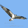 "Osprey with fish © 2009 C. M. Neri.  Laguna Atascosa NWR, TX OSPRTX  <div class=""ss-paypal-button""><div class=""ss-paypal-add-to-cart-section""><div class=""ss-paypal-product-options""><h4>Mat Sizes</h4><ul><li><a href=""https://www.paypal.com/cgi-bin/webscr?cmd=_cart&business=T77V5VKCW4K2U&lc=US&item_name=Osprey%20with%20fish%20%C2%A9%202009%20C.%20M.%20Neri.%20%20Laguna%20Atascosa%20NWR%2C%20TX%20OSPRTX&item_number=http%3A%2F%2Fwww.nightflightimages.com%2FGalleries-1%2FHawks%2Fi-zX52Zn8&button_subtype=products&no_note=0&cn=Add%20special%20instructions%20to%20the%20seller%3A&no_shipping=2&currency_code=USD&weight_unit=lbs&add=1&bn=PP-ShopCartBF%3Abtn_cart_SM.gif%3ANonHosted&on0=Mat%20Sizes&option_select0=5%20x%207&option_amount0=10.00&option_select1=8%20x%2010&option_amount1=18.00&option_select2=11%20x%2014&option_amount2=28.00&option_select3=card&option_amount3=4.00&option_index=0&charset=utf-8&submit=&os0=5%20x%207"" target=""paypal""><span>5 x 7 $11.00 USD</span><img src=""https://www.paypalobjects.com/en_US/i/btn/btn_cart_SM.gif""></a></li><li><a href=""https://www.paypal.com/cgi-bin/webscr?cmd=_cart&business=T77V5VKCW4K2U&lc=US&item_name=Osprey%20with%20fish%20%C2%A9%202009%20C.%20M.%20Neri.%20%20Laguna%20Atascosa%20NWR%2C%20TX%20OSPRTX&item_number=http%3A%2F%2Fwww.nightflightimages.com%2FGalleries-1%2FHawks%2Fi-zX52Zn8&button_subtype=products&no_note=0&cn=Add%20special%20instructions%20to%20the%20seller%3A&no_shipping=2&currency_code=USD&weight_unit=lbs&add=1&bn=PP-ShopCartBF%3Abtn_cart_SM.gif%3ANonHosted&on0=Mat%20Sizes&option_select0=5%20x%207&option_amount0=10.00&option_select1=8%20x%2010&option_amount1=18.00&option_select2=11%20x%2014&option_amount2=28.00&option_select3=card&option_amount3=4.00&option_index=0&charset=utf-8&submit=&os0=8%20x%2010"" target=""paypal""><span>8 x 10 $19.00 USD</span><img src=""https://www.paypalobjects.com/en_US/i/btn/btn_cart_SM.gif""></a></li><li><a href=""https://www.paypal.com/cgi-bin/webscr?cmd=_cart&business=T77V5VKCW4K2U&lc=US&item_name=Osprey%20with%20fish%20%C2%A9%202009%20C.%20M.%20Neri.%20%20Laguna%20Atascosa%20NWR%2C%20TX%20OSPRTX&item_number=http%3A%2F%2Fwww.nightflightimages.com%2FGalleries-1%2FHawks%2Fi-zX52Zn8&button_subtype=products&no_note=0&cn=Add%20special%20instructions%20to%20the%20seller%3A&no_shipping=2&currency_code=USD&weight_unit=lbs&add=1&bn=PP-ShopCartBF%3Abtn_cart_SM.gif%3ANonHosted&on0=Mat%20Sizes&option_select0=5%20x%207&option_amount0=10.00&option_select1=8%20x%2010&option_amount1=18.00&option_select2=11%20x%2014&option_amount2=28.00&option_select3=card&option_amount3=4.00&option_index=0&charset=utf-8&submit=&os0=11%20x%2014"" target=""paypal""><span>11 x 14 $29.00 USD</span><img src=""https://www.paypalobjects.com/en_US/i/btn/btn_cart_SM.gif""></a></li><li><a href=""https://www.paypal.com/cgi-bin/webscr?cmd=_cart&business=T77V5VKCW4K2U&lc=US&item_name=Osprey%20with%20fish%20%C2%A9%202009%20C.%20M.%20Neri.%20%20Laguna%20Atascosa%20NWR%2C%20TX%20OSPRTX&item_number=http%3A%2F%2Fwww.nightflightimages.com%2FGalleries-1%2FHawks%2Fi-zX52Zn8&button_subtype=products&no_note=0&cn=Add%20special%20instructions%20to%20the%20seller%3A&no_shipping=2&currency_code=USD&weight_unit=lbs&add=1&bn=PP-ShopCartBF%3Abtn_cart_SM.gif%3ANonHosted&on0=Mat%20Sizes&option_select0=5%20x%207&option_amount0=10.00&option_select1=8%20x%2010&option_amount1=18.00&option_select2=11%20x%2014&option_amount2=28.00&option_select3=card&option_amount3=4.00&option_index=0&charset=utf-8&submit=&os0=card"" target=""paypal""><span>card $5.00 USD</span><img src=""https://www.paypalobjects.com/en_US/i/btn/btn_cart_SM.gif""></a></li></ul></div></div> <div class=""ss-paypal-view-cart-section""><a href=""https://www.paypal.com/cgi-bin/webscr?cmd=_cart&business=T77V5VKCW4K2U&display=1&item_name=Osprey%20with%20fish%20%C2%A9%202009%20C.%20M.%20Neri.%20%20Laguna%20Atascosa%20NWR%2C%20TX%20OSPRTX&item_number=http%3A%2F%2Fwww.nightflightimages.com%2FGalleries-1%2FHawks%2Fi-zX52Zn8&charset=utf-8&submit="" target=""paypal"" class=""ss-paypal-submit-button""><img src=""https://www.paypalobjects.com/en_US/i/btn/btn_viewcart_LG.gif""></a></div></div><div class=""ss-paypal-button-end""></div>"