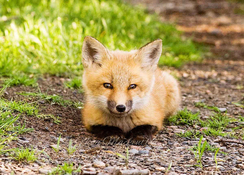 "Red Fox Kit © 2008 Nova Mackentley Whitefish Point, MI FKF  <div class=""ss-paypal-button""><div class=""ss-paypal-add-to-cart-section""><div class=""ss-paypal-product-options""><h4>Mat Sizes</h4><ul><li><a href=""https://www.paypal.com/cgi-bin/webscr?cmd=_cart&business=T77V5VKCW4K2U&lc=US&item_name=Red%20Fox%20Kit%20%C2%A9%202008%20Nova%20Mackentley%20Whitefish%20Point%2C%20MI%20FKF&item_number=http%3A%2F%2Fwww.nightflightimages.com%2FGalleries-1%2FMammals%2Fi-9mWkGmC&button_subtype=products&no_note=0&cn=Add%20special%20instructions%20to%20the%20seller%3A&no_shipping=2&currency_code=USD&weight_unit=lbs&add=1&bn=PP-ShopCartBF%3Abtn_cart_SM.gif%3ANonHosted&on0=Mat%20Sizes&option_select0=5%20x%207&option_amount0=10.00&option_select1=8%20x%2010&option_amount1=18.00&option_select2=11%20x%2014&option_amount2=28.00&option_select3=card&option_amount3=4.00&option_index=0&charset=utf-8&submit=&os0=5%20x%207"" target=""paypal""><span>5 x 7 $11.00 USD</span><img src=""https://www.paypalobjects.com/en_US/i/btn/btn_cart_SM.gif""></a></li><li><a href=""https://www.paypal.com/cgi-bin/webscr?cmd=_cart&business=T77V5VKCW4K2U&lc=US&item_name=Red%20Fox%20Kit%20%C2%A9%202008%20Nova%20Mackentley%20Whitefish%20Point%2C%20MI%20FKF&item_number=http%3A%2F%2Fwww.nightflightimages.com%2FGalleries-1%2FMammals%2Fi-9mWkGmC&button_subtype=products&no_note=0&cn=Add%20special%20instructions%20to%20the%20seller%3A&no_shipping=2&currency_code=USD&weight_unit=lbs&add=1&bn=PP-ShopCartBF%3Abtn_cart_SM.gif%3ANonHosted&on0=Mat%20Sizes&option_select0=5%20x%207&option_amount0=10.00&option_select1=8%20x%2010&option_amount1=18.00&option_select2=11%20x%2014&option_amount2=28.00&option_select3=card&option_amount3=4.00&option_index=0&charset=utf-8&submit=&os0=8%20x%2010"" target=""paypal""><span>8 x 10 $19.00 USD</span><img src=""https://www.paypalobjects.com/en_US/i/btn/btn_cart_SM.gif""></a></li><li><a href=""https://www.paypal.com/cgi-bin/webscr?cmd=_cart&business=T77V5VKCW4K2U&lc=US&item_name=Red%20Fox%20Kit%20%C2%A9%202008%20Nova%20Mackentley%20Whitefish%20Point%2C%20MI%20FKF&item_number=http%3A%2F%2Fwww.nightflightimages.com%2FGalleries-1%2FMammals%2Fi-9mWkGmC&button_subtype=products&no_note=0&cn=Add%20special%20instructions%20to%20the%20seller%3A&no_shipping=2&currency_code=USD&weight_unit=lbs&add=1&bn=PP-ShopCartBF%3Abtn_cart_SM.gif%3ANonHosted&on0=Mat%20Sizes&option_select0=5%20x%207&option_amount0=10.00&option_select1=8%20x%2010&option_amount1=18.00&option_select2=11%20x%2014&option_amount2=28.00&option_select3=card&option_amount3=4.00&option_index=0&charset=utf-8&submit=&os0=11%20x%2014"" target=""paypal""><span>11 x 14 $29.00 USD</span><img src=""https://www.paypalobjects.com/en_US/i/btn/btn_cart_SM.gif""></a></li><li><a href=""https://www.paypal.com/cgi-bin/webscr?cmd=_cart&business=T77V5VKCW4K2U&lc=US&item_name=Red%20Fox%20Kit%20%C2%A9%202008%20Nova%20Mackentley%20Whitefish%20Point%2C%20MI%20FKF&item_number=http%3A%2F%2Fwww.nightflightimages.com%2FGalleries-1%2FMammals%2Fi-9mWkGmC&button_subtype=products&no_note=0&cn=Add%20special%20instructions%20to%20the%20seller%3A&no_shipping=2&currency_code=USD&weight_unit=lbs&add=1&bn=PP-ShopCartBF%3Abtn_cart_SM.gif%3ANonHosted&on0=Mat%20Sizes&option_select0=5%20x%207&option_amount0=10.00&option_select1=8%20x%2010&option_amount1=18.00&option_select2=11%20x%2014&option_amount2=28.00&option_select3=card&option_amount3=4.00&option_index=0&charset=utf-8&submit=&os0=card"" target=""paypal""><span>card $5.00 USD</span><img src=""https://www.paypalobjects.com/en_US/i/btn/btn_cart_SM.gif""></a></li></ul></div></div> <div class=""ss-paypal-view-cart-section""><a href=""https://www.paypal.com/cgi-bin/webscr?cmd=_cart&business=T77V5VKCW4K2U&display=1&item_name=Red%20Fox%20Kit%20%C2%A9%202008%20Nova%20Mackentley%20Whitefish%20Point%2C%20MI%20FKF&item_number=http%3A%2F%2Fwww.nightflightimages.com%2FGalleries-1%2FMammals%2Fi-9mWkGmC&charset=utf-8&submit="" target=""paypal"" class=""ss-paypal-submit-button""><img src=""https://www.paypalobjects.com/en_US/i/btn/btn_viewcart_LG.gif""></a></div></div><div class=""ss-paypal-button-end""></div>"