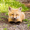 "Red Fox Kit © 2008 Nova Mackentley Whitefish Point, MI FKF  <div class=""ss-paypal-button""><div class=""ss-paypal-add-to-cart-section""><div class=""ss-paypal-product-options""><h4>Mat Sizes</h4><ul><li><a href=""https://www.paypal.com/cgi-bin/webscr?cmd=_cart&amp;business=T77V5VKCW4K2U&amp;lc=US&amp;item_name=Red%20Fox%20Kit%20%C2%A9%202008%20Nova%20Mackentley%20Whitefish%20Point%2C%20MI%20FKF&amp;item_number=http%3A%2F%2Fwww.nightflightimages.com%2FGalleries-1%2FMammals%2Fi-9mWkGmC&amp;button_subtype=products&amp;no_note=0&amp;cn=Add%20special%20instructions%20to%20the%20seller%3A&amp;no_shipping=2&amp;currency_code=USD&amp;weight_unit=lbs&amp;add=1&amp;bn=PP-ShopCartBF%3Abtn_cart_SM.gif%3ANonHosted&amp;on0=Mat%20Sizes&amp;option_select0=5%20x%207&amp;option_amount0=10.00&amp;option_select1=8%20x%2010&amp;option_amount1=18.00&amp;option_select2=11%20x%2014&amp;option_amount2=28.00&amp;option_select3=card&amp;option_amount3=4.00&amp;option_index=0&amp;charset=utf-8&amp;submit=&amp;os0=5%20x%207"" target=""paypal""><span>5 x 7 $11.00 USD</span><img src=""https://www.paypalobjects.com/en_US/i/btn/btn_cart_SM.gif""></a></li><li><a href=""https://www.paypal.com/cgi-bin/webscr?cmd=_cart&amp;business=T77V5VKCW4K2U&amp;lc=US&amp;item_name=Red%20Fox%20Kit%20%C2%A9%202008%20Nova%20Mackentley%20Whitefish%20Point%2C%20MI%20FKF&amp;item_number=http%3A%2F%2Fwww.nightflightimages.com%2FGalleries-1%2FMammals%2Fi-9mWkGmC&amp;button_subtype=products&amp;no_note=0&amp;cn=Add%20special%20instructions%20to%20the%20seller%3A&amp;no_shipping=2&amp;currency_code=USD&amp;weight_unit=lbs&amp;add=1&amp;bn=PP-ShopCartBF%3Abtn_cart_SM.gif%3ANonHosted&amp;on0=Mat%20Sizes&amp;option_select0=5%20x%207&amp;option_amount0=10.00&amp;option_select1=8%20x%2010&amp;option_amount1=18.00&amp;option_select2=11%20x%2014&amp;option_amount2=28.00&amp;option_select3=card&amp;option_amount3=4.00&amp;option_index=0&amp;charset=utf-8&amp;submit=&amp;os0=8%20x%2010"" target=""paypal""><span>8 x 10 $19.00 USD</span><img src=""https://www.paypalobjects.com/en_US/i/btn/btn_cart_SM.gif""></a></li><li><a href=""https://www.paypal.com/cgi-bin/webscr?cmd=_cart&amp;business=T77V5VKCW4K2U&amp;lc=US&amp;item_name=Red%20Fox%20Kit%20%C2%A9%202008%20Nova%20Mackentley%20Whitefish%20Point%2C%20MI%20FKF&amp;item_number=http%3A%2F%2Fwww.nightflightimages.com%2FGalleries-1%2FMammals%2Fi-9mWkGmC&amp;button_subtype=products&amp;no_note=0&amp;cn=Add%20special%20instructions%20to%20the%20seller%3A&amp;no_shipping=2&amp;currency_code=USD&amp;weight_unit=lbs&amp;add=1&amp;bn=PP-ShopCartBF%3Abtn_cart_SM.gif%3ANonHosted&amp;on0=Mat%20Sizes&amp;option_select0=5%20x%207&amp;option_amount0=10.00&amp;option_select1=8%20x%2010&amp;option_amount1=18.00&amp;option_select2=11%20x%2014&amp;option_amount2=28.00&amp;option_select3=card&amp;option_amount3=4.00&amp;option_index=0&amp;charset=utf-8&amp;submit=&amp;os0=11%20x%2014"" target=""paypal""><span>11 x 14 $29.00 USD</span><img src=""https://www.paypalobjects.com/en_US/i/btn/btn_cart_SM.gif""></a></li><li><a href=""https://www.paypal.com/cgi-bin/webscr?cmd=_cart&amp;business=T77V5VKCW4K2U&amp;lc=US&amp;item_name=Red%20Fox%20Kit%20%C2%A9%202008%20Nova%20Mackentley%20Whitefish%20Point%2C%20MI%20FKF&amp;item_number=http%3A%2F%2Fwww.nightflightimages.com%2FGalleries-1%2FMammals%2Fi-9mWkGmC&amp;button_subtype=products&amp;no_note=0&amp;cn=Add%20special%20instructions%20to%20the%20seller%3A&amp;no_shipping=2&amp;currency_code=USD&amp;weight_unit=lbs&amp;add=1&amp;bn=PP-ShopCartBF%3Abtn_cart_SM.gif%3ANonHosted&amp;on0=Mat%20Sizes&amp;option_select0=5%20x%207&amp;option_amount0=10.00&amp;option_select1=8%20x%2010&amp;option_amount1=18.00&amp;option_select2=11%20x%2014&amp;option_amount2=28.00&amp;option_select3=card&amp;option_amount3=4.00&amp;option_index=0&amp;charset=utf-8&amp;submit=&amp;os0=card"" target=""paypal""><span>card $5.00 USD</span><img src=""https://www.paypalobjects.com/en_US/i/btn/btn_cart_SM.gif""></a></li></ul></div></div> <div class=""ss-paypal-view-cart-section""><a href=""https://www.paypal.com/cgi-bin/webscr?cmd=_cart&amp;business=T77V5VKCW4K2U&amp;display=1&amp;item_name=Red%20Fox%20Kit%20%C2%A9%202008%20Nova%20Mackentley%20Whitefish%20Point%2C%20MI%20FKF&amp;item_number=http%3A%2F%2Fwww.nightflightimages.com%2FGalleries-1%2FMammals%2Fi-9mWkGmC&amp;charset=utf-8&amp;submit="" target=""paypal"" class=""ss-paypal-submit-button""><img src=""https://www.paypalobjects.com/en_US/i/btn/btn_viewcart_LG.gif""></a></div></div><div class=""ss-paypal-button-end""></div>"