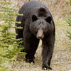 "Black Bear © 2017 Chris M Neri Icefields Parkway, AB BLBE  <div class=""ss-paypal-button""><div class=""ss-paypal-add-to-cart-section""><div class=""ss-paypal-product-options""><h4>Mat Sizes</h4><ul><li><a href=""https://www.paypal.com/cgi-bin/webscr?cmd=_cart&business=T77V5VKCW4K2U&lc=US&item_name=Black%20Bear%20%C2%A9%202017%20Chris%20M%20Neri%20Icefields%20Parkway%2C%20AB%20BLBE&item_number=http%3A%2F%2Fwww.nightflightimages.com%2FGalleries-1%2FNew%2Fi-BLjXhk9&button_subtype=products&no_note=0&cn=Add%20special%20instructions%20to%20the%20seller%3A&no_shipping=2&currency_code=USD&weight_unit=lbs&add=1&bn=PP-ShopCartBF%3Abtn_cart_SM.gif%3ANonHosted&on0=Mat%20Sizes&option_select0=5%20x%207&option_amount0=12.00&option_select1=8%20x%2010&option_amount1=19.00&option_select2=11%20x%2014&option_amount2=29.00&option_select3=card&option_amount3=5.00&option_index=0&charset=utf-8&submit=&os0=5%20x%207"" target=""paypal""><span>5 x 7 $12.00 USD</span><img src=""https://www.paypalobjects.com/en_US/i/btn/btn_cart_SM.gif""></a></li><li><a href=""https://www.paypal.com/cgi-bin/webscr?cmd=_cart&business=T77V5VKCW4K2U&lc=US&item_name=Black%20Bear%20%C2%A9%202017%20Chris%20M%20Neri%20Icefields%20Parkway%2C%20AB%20BLBE&item_number=http%3A%2F%2Fwww.nightflightimages.com%2FGalleries-1%2FNew%2Fi-BLjXhk9&button_subtype=products&no_note=0&cn=Add%20special%20instructions%20to%20the%20seller%3A&no_shipping=2&currency_code=USD&weight_unit=lbs&add=1&bn=PP-ShopCartBF%3Abtn_cart_SM.gif%3ANonHosted&on0=Mat%20Sizes&option_select0=5%20x%207&option_amount0=12.00&option_select1=8%20x%2010&option_amount1=19.00&option_select2=11%20x%2014&option_amount2=29.00&option_select3=card&option_amount3=5.00&option_index=0&charset=utf-8&submit=&os0=8%20x%2010"" target=""paypal""><span>8 x 10 $19.00 USD</span><img src=""https://www.paypalobjects.com/en_US/i/btn/btn_cart_SM.gif""></a></li><li><a href=""https://www.paypal.com/cgi-bin/webscr?cmd=_cart&business=T77V5VKCW4K2U&lc=US&item_name=Black%20Bear%20%C2%A9%202017%20Chris%20M%20Neri%20Icefields%20Parkway%2C%20AB%20BLBE&item_number=http%3A%2F%2Fwww.nightflightimages.com%2FGalleries-1%2FNew%2Fi-BLjXhk9&button_subtype=products&no_note=0&cn=Add%20special%20instructions%20to%20the%20seller%3A&no_shipping=2&currency_code=USD&weight_unit=lbs&add=1&bn=PP-ShopCartBF%3Abtn_cart_SM.gif%3ANonHosted&on0=Mat%20Sizes&option_select0=5%20x%207&option_amount0=12.00&option_select1=8%20x%2010&option_amount1=19.00&option_select2=11%20x%2014&option_amount2=29.00&option_select3=card&option_amount3=5.00&option_index=0&charset=utf-8&submit=&os0=11%20x%2014"" target=""paypal""><span>11 x 14 $29.00 USD</span><img src=""https://www.paypalobjects.com/en_US/i/btn/btn_cart_SM.gif""></a></li><li><a href=""https://www.paypal.com/cgi-bin/webscr?cmd=_cart&business=T77V5VKCW4K2U&lc=US&item_name=Black%20Bear%20%C2%A9%202017%20Chris%20M%20Neri%20Icefields%20Parkway%2C%20AB%20BLBE&item_number=http%3A%2F%2Fwww.nightflightimages.com%2FGalleries-1%2FNew%2Fi-BLjXhk9&button_subtype=products&no_note=0&cn=Add%20special%20instructions%20to%20the%20seller%3A&no_shipping=2&currency_code=USD&weight_unit=lbs&add=1&bn=PP-ShopCartBF%3Abtn_cart_SM.gif%3ANonHosted&on0=Mat%20Sizes&option_select0=5%20x%207&option_amount0=12.00&option_select1=8%20x%2010&option_amount1=19.00&option_select2=11%20x%2014&option_amount2=29.00&option_select3=card&option_amount3=5.00&option_index=0&charset=utf-8&submit=&os0=card"" target=""paypal""><span>card $5.00 USD</span><img src=""https://www.paypalobjects.com/en_US/i/btn/btn_cart_SM.gif""></a></li></ul></div></div> <div class=""ss-paypal-view-cart-section""><a href=""https://www.paypal.com/cgi-bin/webscr?cmd=_cart&business=T77V5VKCW4K2U&display=1&item_name=Black%20Bear%20%C2%A9%202017%20Chris%20M%20Neri%20Icefields%20Parkway%2C%20AB%20BLBE&item_number=http%3A%2F%2Fwww.nightflightimages.com%2FGalleries-1%2FNew%2Fi-BLjXhk9&charset=utf-8&submit="" target=""paypal"" class=""ss-paypal-submit-button""><img src=""https://www.paypalobjects.com/en_US/i/btn/btn_viewcart_LG.gif""></a></div></div><div class=""ss-paypal-button-end""></div>"