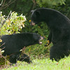 "Bears fighting © 2014 Nova Mackentley Duluth, MN  BFI  <div class=""ss-paypal-button""><div class=""ss-paypal-add-to-cart-section""><div class=""ss-paypal-product-options""><h4>Mat Sizes</h4><ul><li><a href=""https://www.paypal.com/cgi-bin/webscr?cmd=_cart&business=T77V5VKCW4K2U&lc=US&item_name=Bears%20fighting%20%C2%A9%202014%20Nova%20Mackentley%20Duluth%2C%20MN%20%20BFI&item_number=http%3A%2F%2Fwww.nightflightimages.com%2FGalleries-1%2FMammals%2Fi-DPgxg3q&button_subtype=products&no_note=0&cn=Add%20special%20instructions%20to%20the%20seller%3A&no_shipping=2&currency_code=USD&weight_unit=lbs&add=1&bn=PP-ShopCartBF%3Abtn_cart_SM.gif%3ANonHosted&on0=Mat%20Sizes&option_select0=5%20x%207&option_amount0=10.00&option_select1=8%20x%2010&option_amount1=18.00&option_select2=11%20x%2014&option_amount2=28.00&option_select3=card&option_amount3=4.00&option_index=0&charset=utf-8&submit=&os0=5%20x%207"" target=""paypal""><span>5 x 7 $11.00 USD</span><img src=""https://www.paypalobjects.com/en_US/i/btn/btn_cart_SM.gif""></a></li><li><a href=""https://www.paypal.com/cgi-bin/webscr?cmd=_cart&business=T77V5VKCW4K2U&lc=US&item_name=Bears%20fighting%20%C2%A9%202014%20Nova%20Mackentley%20Duluth%2C%20MN%20%20BFI&item_number=http%3A%2F%2Fwww.nightflightimages.com%2FGalleries-1%2FMammals%2Fi-DPgxg3q&button_subtype=products&no_note=0&cn=Add%20special%20instructions%20to%20the%20seller%3A&no_shipping=2&currency_code=USD&weight_unit=lbs&add=1&bn=PP-ShopCartBF%3Abtn_cart_SM.gif%3ANonHosted&on0=Mat%20Sizes&option_select0=5%20x%207&option_amount0=10.00&option_select1=8%20x%2010&option_amount1=18.00&option_select2=11%20x%2014&option_amount2=28.00&option_select3=card&option_amount3=4.00&option_index=0&charset=utf-8&submit=&os0=8%20x%2010"" target=""paypal""><span>8 x 10 $19.00 USD</span><img src=""https://www.paypalobjects.com/en_US/i/btn/btn_cart_SM.gif""></a></li><li><a href=""https://www.paypal.com/cgi-bin/webscr?cmd=_cart&business=T77V5VKCW4K2U&lc=US&item_name=Bears%20fighting%20%C2%A9%202014%20Nova%20Mackentley%20Duluth%2C%20MN%20%20BFI&item_number=http%3A%2F%2Fwww.nightflightimages.com%2FGalleries-1%2FMammals%2Fi-DPgxg3q&button_subtype=products&no_note=0&cn=Add%20special%20instructions%20to%20the%20seller%3A&no_shipping=2&currency_code=USD&weight_unit=lbs&add=1&bn=PP-ShopCartBF%3Abtn_cart_SM.gif%3ANonHosted&on0=Mat%20Sizes&option_select0=5%20x%207&option_amount0=10.00&option_select1=8%20x%2010&option_amount1=18.00&option_select2=11%20x%2014&option_amount2=28.00&option_select3=card&option_amount3=4.00&option_index=0&charset=utf-8&submit=&os0=11%20x%2014"" target=""paypal""><span>11 x 14 $29.00 USD</span><img src=""https://www.paypalobjects.com/en_US/i/btn/btn_cart_SM.gif""></a></li><li><a href=""https://www.paypal.com/cgi-bin/webscr?cmd=_cart&business=T77V5VKCW4K2U&lc=US&item_name=Bears%20fighting%20%C2%A9%202014%20Nova%20Mackentley%20Duluth%2C%20MN%20%20BFI&item_number=http%3A%2F%2Fwww.nightflightimages.com%2FGalleries-1%2FMammals%2Fi-DPgxg3q&button_subtype=products&no_note=0&cn=Add%20special%20instructions%20to%20the%20seller%3A&no_shipping=2&currency_code=USD&weight_unit=lbs&add=1&bn=PP-ShopCartBF%3Abtn_cart_SM.gif%3ANonHosted&on0=Mat%20Sizes&option_select0=5%20x%207&option_amount0=10.00&option_select1=8%20x%2010&option_amount1=18.00&option_select2=11%20x%2014&option_amount2=28.00&option_select3=card&option_amount3=4.00&option_index=0&charset=utf-8&submit=&os0=card"" target=""paypal""><span>card $5.00 USD</span><img src=""https://www.paypalobjects.com/en_US/i/btn/btn_cart_SM.gif""></a></li></ul></div></div> <div class=""ss-paypal-view-cart-section""><a href=""https://www.paypal.com/cgi-bin/webscr?cmd=_cart&business=T77V5VKCW4K2U&display=1&item_name=Bears%20fighting%20%C2%A9%202014%20Nova%20Mackentley%20Duluth%2C%20MN%20%20BFI&item_number=http%3A%2F%2Fwww.nightflightimages.com%2FGalleries-1%2FMammals%2Fi-DPgxg3q&charset=utf-8&submit="" target=""paypal"" class=""ss-paypal-submit-button""><img src=""https://www.paypalobjects.com/en_US/i/btn/btn_viewcart_LG.gif""></a></div></div><div class=""ss-paypal-button-end""></div>"