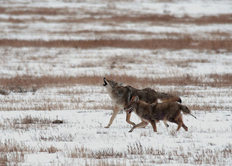 "Coyotes  © 2012 C. M. Neri Yellowstone National Park, WY COYOY12  <div class=""ss-paypal-button""><div class=""ss-paypal-add-to-cart-section""><div class=""ss-paypal-product-options""><h4>Mat Sizes</h4><ul><li><a href=""https://www.paypal.com/cgi-bin/webscr?cmd=_cart&business=T77V5VKCW4K2U&lc=US&item_name=Coyotes%20%20%C2%A9%202012%20C.%20M.%20Neri%20Yellowstone%20National%20Park%2C%20WY%20COYOY12&item_number=http%3A%2F%2Fwww.nightflightimages.com%2FGalleries-1%2FMammals%2Fi-FLBnX9r&button_subtype=products&no_note=0&cn=Add%20special%20instructions%20to%20the%20seller%3A&no_shipping=2&currency_code=USD&weight_unit=lbs&add=1&bn=PP-ShopCartBF%3Abtn_cart_SM.gif%3ANonHosted&on0=Mat%20Sizes&option_select0=5%20x%207&option_amount0=10.00&option_select1=8%20x%2010&option_amount1=18.00&option_select2=11%20x%2014&option_amount2=28.00&option_select3=card&option_amount3=4.00&option_index=0&charset=utf-8&submit=&os0=5%20x%207"" target=""paypal""><span>5 x 7 $11.00 USD</span><img src=""https://www.paypalobjects.com/en_US/i/btn/btn_cart_SM.gif""></a></li><li><a href=""https://www.paypal.com/cgi-bin/webscr?cmd=_cart&business=T77V5VKCW4K2U&lc=US&item_name=Coyotes%20%20%C2%A9%202012%20C.%20M.%20Neri%20Yellowstone%20National%20Park%2C%20WY%20COYOY12&item_number=http%3A%2F%2Fwww.nightflightimages.com%2FGalleries-1%2FMammals%2Fi-FLBnX9r&button_subtype=products&no_note=0&cn=Add%20special%20instructions%20to%20the%20seller%3A&no_shipping=2&currency_code=USD&weight_unit=lbs&add=1&bn=PP-ShopCartBF%3Abtn_cart_SM.gif%3ANonHosted&on0=Mat%20Sizes&option_select0=5%20x%207&option_amount0=10.00&option_select1=8%20x%2010&option_amount1=18.00&option_select2=11%20x%2014&option_amount2=28.00&option_select3=card&option_amount3=4.00&option_index=0&charset=utf-8&submit=&os0=8%20x%2010"" target=""paypal""><span>8 x 10 $19.00 USD</span><img src=""https://www.paypalobjects.com/en_US/i/btn/btn_cart_SM.gif""></a></li><li><a href=""https://www.paypal.com/cgi-bin/webscr?cmd=_cart&business=T77V5VKCW4K2U&lc=US&item_name=Coyotes%20%20%C2%A9%202012%20C.%20M.%20Neri%20Yellowstone%20National%20Park%2C%20WY%20COYOY12&item_number=http%3A%2F%2Fwww.nightflightimages.com%2FGalleries-1%2FMammals%2Fi-FLBnX9r&button_subtype=products&no_note=0&cn=Add%20special%20instructions%20to%20the%20seller%3A&no_shipping=2&currency_code=USD&weight_unit=lbs&add=1&bn=PP-ShopCartBF%3Abtn_cart_SM.gif%3ANonHosted&on0=Mat%20Sizes&option_select0=5%20x%207&option_amount0=10.00&option_select1=8%20x%2010&option_amount1=18.00&option_select2=11%20x%2014&option_amount2=28.00&option_select3=card&option_amount3=4.00&option_index=0&charset=utf-8&submit=&os0=11%20x%2014"" target=""paypal""><span>11 x 14 $29.00 USD</span><img src=""https://www.paypalobjects.com/en_US/i/btn/btn_cart_SM.gif""></a></li><li><a href=""https://www.paypal.com/cgi-bin/webscr?cmd=_cart&business=T77V5VKCW4K2U&lc=US&item_name=Coyotes%20%20%C2%A9%202012%20C.%20M.%20Neri%20Yellowstone%20National%20Park%2C%20WY%20COYOY12&item_number=http%3A%2F%2Fwww.nightflightimages.com%2FGalleries-1%2FMammals%2Fi-FLBnX9r&button_subtype=products&no_note=0&cn=Add%20special%20instructions%20to%20the%20seller%3A&no_shipping=2&currency_code=USD&weight_unit=lbs&add=1&bn=PP-ShopCartBF%3Abtn_cart_SM.gif%3ANonHosted&on0=Mat%20Sizes&option_select0=5%20x%207&option_amount0=10.00&option_select1=8%20x%2010&option_amount1=18.00&option_select2=11%20x%2014&option_amount2=28.00&option_select3=card&option_amount3=4.00&option_index=0&charset=utf-8&submit=&os0=card"" target=""paypal""><span>card $5.00 USD</span><img src=""https://www.paypalobjects.com/en_US/i/btn/btn_cart_SM.gif""></a></li></ul></div></div> <div class=""ss-paypal-view-cart-section""><a href=""https://www.paypal.com/cgi-bin/webscr?cmd=_cart&business=T77V5VKCW4K2U&display=1&item_name=Coyotes%20%20%C2%A9%202012%20C.%20M.%20Neri%20Yellowstone%20National%20Park%2C%20WY%20COYOY12&item_number=http%3A%2F%2Fwww.nightflightimages.com%2FGalleries-1%2FMammals%2Fi-FLBnX9r&charset=utf-8&submit="" target=""paypal"" class=""ss-paypal-submit-button""><img src=""https://www.paypalobjects.com/en_US/i/btn/btn_viewcart_LG.gif""></a></div></div><div class=""ss-paypal-button-end""></div>"
