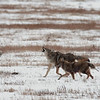 "Coyotes  © 2012 C. M. Neri Yellowstone National Park, WY COYOY12  <div class=""ss-paypal-button""><div class=""ss-paypal-add-to-cart-section""><div class=""ss-paypal-product-options""><h4>Mat Sizes</h4><ul><li><a href=""https://www.paypal.com/cgi-bin/webscr?cmd=_cart&amp;business=T77V5VKCW4K2U&amp;lc=US&amp;item_name=Coyotes%20%20%C2%A9%202012%20C.%20M.%20Neri%20Yellowstone%20National%20Park%2C%20WY%20COYOY12&amp;item_number=http%3A%2F%2Fwww.nightflightimages.com%2FGalleries-1%2FMammals%2Fi-FLBnX9r&amp;button_subtype=products&amp;no_note=0&amp;cn=Add%20special%20instructions%20to%20the%20seller%3A&amp;no_shipping=2&amp;currency_code=USD&amp;weight_unit=lbs&amp;add=1&amp;bn=PP-ShopCartBF%3Abtn_cart_SM.gif%3ANonHosted&amp;on0=Mat%20Sizes&amp;option_select0=5%20x%207&amp;option_amount0=10.00&amp;option_select1=8%20x%2010&amp;option_amount1=18.00&amp;option_select2=11%20x%2014&amp;option_amount2=28.00&amp;option_select3=card&amp;option_amount3=4.00&amp;option_index=0&amp;charset=utf-8&amp;submit=&amp;os0=5%20x%207"" target=""paypal""><span>5 x 7 $11.00 USD</span><img src=""https://www.paypalobjects.com/en_US/i/btn/btn_cart_SM.gif""></a></li><li><a href=""https://www.paypal.com/cgi-bin/webscr?cmd=_cart&amp;business=T77V5VKCW4K2U&amp;lc=US&amp;item_name=Coyotes%20%20%C2%A9%202012%20C.%20M.%20Neri%20Yellowstone%20National%20Park%2C%20WY%20COYOY12&amp;item_number=http%3A%2F%2Fwww.nightflightimages.com%2FGalleries-1%2FMammals%2Fi-FLBnX9r&amp;button_subtype=products&amp;no_note=0&amp;cn=Add%20special%20instructions%20to%20the%20seller%3A&amp;no_shipping=2&amp;currency_code=USD&amp;weight_unit=lbs&amp;add=1&amp;bn=PP-ShopCartBF%3Abtn_cart_SM.gif%3ANonHosted&amp;on0=Mat%20Sizes&amp;option_select0=5%20x%207&amp;option_amount0=10.00&amp;option_select1=8%20x%2010&amp;option_amount1=18.00&amp;option_select2=11%20x%2014&amp;option_amount2=28.00&amp;option_select3=card&amp;option_amount3=4.00&amp;option_index=0&amp;charset=utf-8&amp;submit=&amp;os0=8%20x%2010"" target=""paypal""><span>8 x 10 $19.00 USD</span><img src=""https://www.paypalobjects.com/en_US/i/btn/btn_cart_SM.gif""></a></li><li><a href=""https://www.paypal.com/cgi-bin/webscr?cmd=_cart&amp;business=T77V5VKCW4K2U&amp;lc=US&amp;item_name=Coyotes%20%20%C2%A9%202012%20C.%20M.%20Neri%20Yellowstone%20National%20Park%2C%20WY%20COYOY12&amp;item_number=http%3A%2F%2Fwww.nightflightimages.com%2FGalleries-1%2FMammals%2Fi-FLBnX9r&amp;button_subtype=products&amp;no_note=0&amp;cn=Add%20special%20instructions%20to%20the%20seller%3A&amp;no_shipping=2&amp;currency_code=USD&amp;weight_unit=lbs&amp;add=1&amp;bn=PP-ShopCartBF%3Abtn_cart_SM.gif%3ANonHosted&amp;on0=Mat%20Sizes&amp;option_select0=5%20x%207&amp;option_amount0=10.00&amp;option_select1=8%20x%2010&amp;option_amount1=18.00&amp;option_select2=11%20x%2014&amp;option_amount2=28.00&amp;option_select3=card&amp;option_amount3=4.00&amp;option_index=0&amp;charset=utf-8&amp;submit=&amp;os0=11%20x%2014"" target=""paypal""><span>11 x 14 $29.00 USD</span><img src=""https://www.paypalobjects.com/en_US/i/btn/btn_cart_SM.gif""></a></li><li><a href=""https://www.paypal.com/cgi-bin/webscr?cmd=_cart&amp;business=T77V5VKCW4K2U&amp;lc=US&amp;item_name=Coyotes%20%20%C2%A9%202012%20C.%20M.%20Neri%20Yellowstone%20National%20Park%2C%20WY%20COYOY12&amp;item_number=http%3A%2F%2Fwww.nightflightimages.com%2FGalleries-1%2FMammals%2Fi-FLBnX9r&amp;button_subtype=products&amp;no_note=0&amp;cn=Add%20special%20instructions%20to%20the%20seller%3A&amp;no_shipping=2&amp;currency_code=USD&amp;weight_unit=lbs&amp;add=1&amp;bn=PP-ShopCartBF%3Abtn_cart_SM.gif%3ANonHosted&amp;on0=Mat%20Sizes&amp;option_select0=5%20x%207&amp;option_amount0=10.00&amp;option_select1=8%20x%2010&amp;option_amount1=18.00&amp;option_select2=11%20x%2014&amp;option_amount2=28.00&amp;option_select3=card&amp;option_amount3=4.00&amp;option_index=0&amp;charset=utf-8&amp;submit=&amp;os0=card"" target=""paypal""><span>card $5.00 USD</span><img src=""https://www.paypalobjects.com/en_US/i/btn/btn_cart_SM.gif""></a></li></ul></div></div> <div class=""ss-paypal-view-cart-section""><a href=""https://www.paypal.com/cgi-bin/webscr?cmd=_cart&amp;business=T77V5VKCW4K2U&amp;display=1&amp;item_name=Coyotes%20%20%C2%A9%202012%20C.%20M.%20Neri%20Yellowstone%20National%20Park%2C%20WY%20COYOY12&amp;item_number=http%3A%2F%2Fwww.nightflightimages.com%2FGalleries-1%2FMammals%2Fi-FLBnX9r&amp;charset=utf-8&amp;submit="" target=""paypal"" class=""ss-paypal-submit-button""><img src=""https://www.paypalobjects.com/en_US/i/btn/btn_viewcart_LG.gif""></a></div></div><div class=""ss-paypal-button-end""></div>"